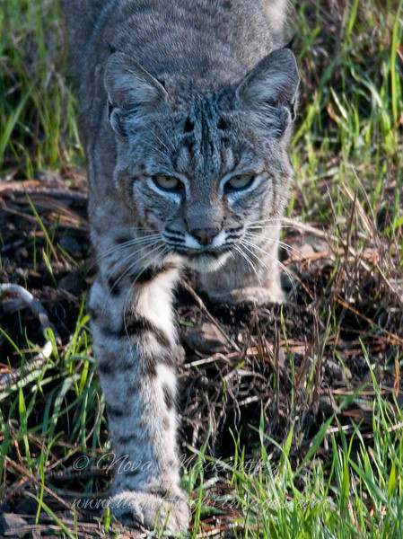 """Bobcat © 2010 Nova Mackentley Northern coast, CA BHO  <div class=""""ss-paypal-button""""><div class=""""ss-paypal-add-to-cart-section""""><div class=""""ss-paypal-product-options""""><h4>Mat Sizes</h4><ul><li><a href=""""https://www.paypal.com/cgi-bin/webscr?cmd=_cart&business=T77V5VKCW4K2U&lc=US&item_name=Bobcat%20%C2%A9%202010%20Nova%20Mackentley%20Northern%20coast%2C%20CA%20BHO&item_number=http%3A%2F%2Fwww.nightflightimages.com%2FGalleries-1%2FTravels%2Fi-GL8hHDQ&button_subtype=products&no_note=0&cn=Add%20special%20instructions%20to%20the%20seller%3A&no_shipping=2&currency_code=USD&weight_unit=lbs&add=1&bn=PP-ShopCartBF%3Abtn_cart_SM.gif%3ANonHosted&on0=Mat%20Sizes&option_select0=5%20x%207&option_amount0=10.00&option_select1=8%20x%2010&option_amount1=18.00&option_select2=11%20x%2014&option_amount2=28.00&option_select3=card&option_amount3=4.00&option_index=0&charset=utf-8&submit=&os0=5%20x%207"""" target=""""paypal""""><span>5 x 7 $11.00 USD</span><img src=""""https://www.paypalobjects.com/en_US/i/btn/btn_cart_SM.gif""""></a></li><li><a href=""""https://www.paypal.com/cgi-bin/webscr?cmd=_cart&business=T77V5VKCW4K2U&lc=US&item_name=Bobcat%20%C2%A9%202010%20Nova%20Mackentley%20Northern%20coast%2C%20CA%20BHO&item_number=http%3A%2F%2Fwww.nightflightimages.com%2FGalleries-1%2FTravels%2Fi-GL8hHDQ&button_subtype=products&no_note=0&cn=Add%20special%20instructions%20to%20the%20seller%3A&no_shipping=2&currency_code=USD&weight_unit=lbs&add=1&bn=PP-ShopCartBF%3Abtn_cart_SM.gif%3ANonHosted&on0=Mat%20Sizes&option_select0=5%20x%207&option_amount0=10.00&option_select1=8%20x%2010&option_amount1=18.00&option_select2=11%20x%2014&option_amount2=28.00&option_select3=card&option_amount3=4.00&option_index=0&charset=utf-8&submit=&os0=8%20x%2010"""" target=""""paypal""""><span>8 x 10 $19.00 USD</span><img src=""""https://www.paypalobjects.com/en_US/i/btn/btn_cart_SM.gif""""></a></li><li><a href=""""https://www.paypal.com/cgi-bin/webscr?cmd=_cart&business=T77V5VKCW4K2U&lc=US&item_name=Bobcat%20%C2%A9%202010%20Nova%20Mackentley%20Northern%20coas"""