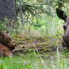 "Moose with baby laying down © 2016 Nova Mackentley Rocky Mtn NP, CO MLD  <div class=""ss-paypal-button""><div class=""ss-paypal-add-to-cart-section""><div class=""ss-paypal-product-options""><h4>Mat Sizes</h4><ul><li><a href=""https://www.paypal.com/cgi-bin/webscr?cmd=_cart&business=T77V5VKCW4K2U&lc=US&item_name=Moose%20with%20baby%20laying%20down%20%C2%A9%202016%20Nova%20Mackentley%20Rocky%20Mtn%20NP%2C%20CO%20MLD&item_number=http%3A%2F%2Fwww.nightflightimages.com%2FGalleries-1%2FMammals%2Fi-GM2N3M4&button_subtype=products&no_note=0&cn=Add%20special%20instructions%20to%20the%20seller%3A&no_shipping=2&currency_code=USD&weight_unit=lbs&add=1&bn=PP-ShopCartBF%3Abtn_cart_SM.gif%3ANonHosted&on0=Mat%20Sizes&option_select0=5%20x%207&option_amount0=10.00&option_select1=8%20x%2010&option_amount1=18.00&option_select2=11%20x%2014&option_amount2=28.00&option_select3=card&option_amount3=4.00&option_index=0&charset=utf-8&submit=&os0=5%20x%207"" target=""paypal""><span>5 x 7 $11.00 USD</span><img src=""https://www.paypalobjects.com/en_US/i/btn/btn_cart_SM.gif""></a></li><li><a href=""https://www.paypal.com/cgi-bin/webscr?cmd=_cart&business=T77V5VKCW4K2U&lc=US&item_name=Moose%20with%20baby%20laying%20down%20%C2%A9%202016%20Nova%20Mackentley%20Rocky%20Mtn%20NP%2C%20CO%20MLD&item_number=http%3A%2F%2Fwww.nightflightimages.com%2FGalleries-1%2FMammals%2Fi-GM2N3M4&button_subtype=products&no_note=0&cn=Add%20special%20instructions%20to%20the%20seller%3A&no_shipping=2&currency_code=USD&weight_unit=lbs&add=1&bn=PP-ShopCartBF%3Abtn_cart_SM.gif%3ANonHosted&on0=Mat%20Sizes&option_select0=5%20x%207&option_amount0=10.00&option_select1=8%20x%2010&option_amount1=18.00&option_select2=11%20x%2014&option_amount2=28.00&option_select3=card&option_amount3=4.00&option_index=0&charset=utf-8&submit=&os0=8%20x%2010"" target=""paypal""><span>8 x 10 $19.00 USD</span><img src=""https://www.paypalobjects.com/en_US/i/btn/btn_cart_SM.gif""></a></li><li><a href=""https://www.paypal.com/cgi-bin/webscr?cmd=_cart&business=T77V5VKCW4K2U&lc=US&item_name=Moose%20with%20baby%20laying%20down%20%C2%A9%202016%20Nova%20Mackentley%20Rocky%20Mtn%20NP%2C%20CO%20MLD&item_number=http%3A%2F%2Fwww.nightflightimages.com%2FGalleries-1%2FMammals%2Fi-GM2N3M4&button_subtype=products&no_note=0&cn=Add%20special%20instructions%20to%20the%20seller%3A&no_shipping=2&currency_code=USD&weight_unit=lbs&add=1&bn=PP-ShopCartBF%3Abtn_cart_SM.gif%3ANonHosted&on0=Mat%20Sizes&option_select0=5%20x%207&option_amount0=10.00&option_select1=8%20x%2010&option_amount1=18.00&option_select2=11%20x%2014&option_amount2=28.00&option_select3=card&option_amount3=4.00&option_index=0&charset=utf-8&submit=&os0=11%20x%2014"" target=""paypal""><span>11 x 14 $29.00 USD</span><img src=""https://www.paypalobjects.com/en_US/i/btn/btn_cart_SM.gif""></a></li><li><a href=""https://www.paypal.com/cgi-bin/webscr?cmd=_cart&business=T77V5VKCW4K2U&lc=US&item_name=Moose%20with%20baby%20laying%20down%20%C2%A9%202016%20Nova%20Mackentley%20Rocky%20Mtn%20NP%2C%20CO%20MLD&item_number=http%3A%2F%2Fwww.nightflightimages.com%2FGalleries-1%2FMammals%2Fi-GM2N3M4&button_subtype=products&no_note=0&cn=Add%20special%20instructions%20to%20the%20seller%3A&no_shipping=2&currency_code=USD&weight_unit=lbs&add=1&bn=PP-ShopCartBF%3Abtn_cart_SM.gif%3ANonHosted&on0=Mat%20Sizes&option_select0=5%20x%207&option_amount0=10.00&option_select1=8%20x%2010&option_amount1=18.00&option_select2=11%20x%2014&option_amount2=28.00&option_select3=card&option_amount3=4.00&option_index=0&charset=utf-8&submit=&os0=card"" target=""paypal""><span>card $5.00 USD</span><img src=""https://www.paypalobjects.com/en_US/i/btn/btn_cart_SM.gif""></a></li></ul></div></div> <div class=""ss-paypal-view-cart-section""><a href=""https://www.paypal.com/cgi-bin/webscr?cmd=_cart&business=T77V5VKCW4K2U&display=1&item_name=Moose%20with%20baby%20laying%20down%20%C2%A9%202016%20Nova%20Mackentley%20Rocky%20Mtn%20NP%2C%20CO%20MLD&item_number=http%3A%2F%2Fwww.nightflightimages.com%2FGalleries-1%2FMammals%2Fi-GM2N3M4&charset=utf-8&submit="" target=""paypal"" class=""ss-paypal-submit-button""><img src=""https://www.paypalobjects.com/en_US/i/btn/btn_viewcart_LG.gif""></a></div></div><div class=""ss-paypal-button-end""></div>"