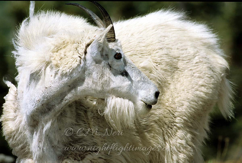 "Mountain Goat © 2002 C. M. Neri.  Glacier National Park, MT MOGO  <div class=""ss-paypal-button""><div class=""ss-paypal-add-to-cart-section""><div class=""ss-paypal-product-options""><h4>Mat Sizes</h4><ul><li><a href=""https://www.paypal.com/cgi-bin/webscr?cmd=_cart&business=T77V5VKCW4K2U&lc=US&item_name=Mountain%20Goat%20%C2%A9%202002%20C.%20M.%20Neri.%20%20Glacier%20National%20Park%2C%20MT%20MOGO&item_number=http%3A%2F%2Fwww.nightflightimages.com%2FGalleries-1%2FTravels%2Fi-MvTB2xh&button_subtype=products&no_note=0&cn=Add%20special%20instructions%20to%20the%20seller%3A&no_shipping=2&currency_code=USD&weight_unit=lbs&add=1&bn=PP-ShopCartBF%3Abtn_cart_SM.gif%3ANonHosted&on0=Mat%20Sizes&option_select0=5%20x%207&option_amount0=10.00&option_select1=8%20x%2010&option_amount1=18.00&option_select2=11%20x%2014&option_amount2=28.00&option_select3=card&option_amount3=4.00&option_index=0&charset=utf-8&submit=&os0=5%20x%207"" target=""paypal""><span>5 x 7 $11.00 USD</span><img src=""https://www.paypalobjects.com/en_US/i/btn/btn_cart_SM.gif""></a></li><li><a href=""https://www.paypal.com/cgi-bin/webscr?cmd=_cart&business=T77V5VKCW4K2U&lc=US&item_name=Mountain%20Goat%20%C2%A9%202002%20C.%20M.%20Neri.%20%20Glacier%20National%20Park%2C%20MT%20MOGO&item_number=http%3A%2F%2Fwww.nightflightimages.com%2FGalleries-1%2FTravels%2Fi-MvTB2xh&button_subtype=products&no_note=0&cn=Add%20special%20instructions%20to%20the%20seller%3A&no_shipping=2&currency_code=USD&weight_unit=lbs&add=1&bn=PP-ShopCartBF%3Abtn_cart_SM.gif%3ANonHosted&on0=Mat%20Sizes&option_select0=5%20x%207&option_amount0=10.00&option_select1=8%20x%2010&option_amount1=18.00&option_select2=11%20x%2014&option_amount2=28.00&option_select3=card&option_amount3=4.00&option_index=0&charset=utf-8&submit=&os0=8%20x%2010"" target=""paypal""><span>8 x 10 $19.00 USD</span><img src=""https://www.paypalobjects.com/en_US/i/btn/btn_cart_SM.gif""></a></li><li><a href=""https://www.paypal.com/cgi-bin/webscr?cmd=_cart&business=T77V5VKCW4K2U&lc=US&item_name=Mountain%20Goat%20%C2%A9%202002%20C.%20M.%20Neri.%20%20Glacier%20National%20Park%2C%20MT%20MOGO&item_number=http%3A%2F%2Fwww.nightflightimages.com%2FGalleries-1%2FTravels%2Fi-MvTB2xh&button_subtype=products&no_note=0&cn=Add%20special%20instructions%20to%20the%20seller%3A&no_shipping=2&currency_code=USD&weight_unit=lbs&add=1&bn=PP-ShopCartBF%3Abtn_cart_SM.gif%3ANonHosted&on0=Mat%20Sizes&option_select0=5%20x%207&option_amount0=10.00&option_select1=8%20x%2010&option_amount1=18.00&option_select2=11%20x%2014&option_amount2=28.00&option_select3=card&option_amount3=4.00&option_index=0&charset=utf-8&submit=&os0=11%20x%2014"" target=""paypal""><span>11 x 14 $29.00 USD</span><img src=""https://www.paypalobjects.com/en_US/i/btn/btn_cart_SM.gif""></a></li><li><a href=""https://www.paypal.com/cgi-bin/webscr?cmd=_cart&business=T77V5VKCW4K2U&lc=US&item_name=Mountain%20Goat%20%C2%A9%202002%20C.%20M.%20Neri.%20%20Glacier%20National%20Park%2C%20MT%20MOGO&item_number=http%3A%2F%2Fwww.nightflightimages.com%2FGalleries-1%2FTravels%2Fi-MvTB2xh&button_subtype=products&no_note=0&cn=Add%20special%20instructions%20to%20the%20seller%3A&no_shipping=2&currency_code=USD&weight_unit=lbs&add=1&bn=PP-ShopCartBF%3Abtn_cart_SM.gif%3ANonHosted&on0=Mat%20Sizes&option_select0=5%20x%207&option_amount0=10.00&option_select1=8%20x%2010&option_amount1=18.00&option_select2=11%20x%2014&option_amount2=28.00&option_select3=card&option_amount3=4.00&option_index=0&charset=utf-8&submit=&os0=card"" target=""paypal""><span>card $5.00 USD</span><img src=""https://www.paypalobjects.com/en_US/i/btn/btn_cart_SM.gif""></a></li></ul></div></div> <div class=""ss-paypal-view-cart-section""><a href=""https://www.paypal.com/cgi-bin/webscr?cmd=_cart&business=T77V5VKCW4K2U&display=1&item_name=Mountain%20Goat%20%C2%A9%202002%20C.%20M.%20Neri.%20%20Glacier%20National%20Park%2C%20MT%20MOGO&item_number=http%3A%2F%2Fwww.nightflightimages.com%2FGalleries-1%2FTravels%2Fi-MvTB2xh&charset=utf-8&submit="" target=""paypal"" class=""ss-paypal-submit-button""><img src=""https://www.paypalobjects.com/en_US/i/btn/btn_viewcart_LG.gif""></a></div></div><div class=""ss-paypal-button-end""></div>"