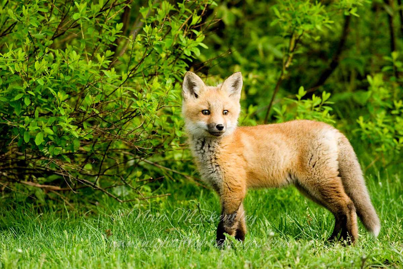 """Red Fox Kit © 2008 Nova Mackentley Whitefish Point, MI FKS  <div class=""""ss-paypal-button""""><div class=""""ss-paypal-add-to-cart-section""""><div class=""""ss-paypal-product-options""""><h4>Mat Sizes</h4><ul><li><a href=""""https://www.paypal.com/cgi-bin/webscr?cmd=_cart&business=T77V5VKCW4K2U&lc=US&item_name=Red%20Fox%20Kit%20%C2%A9%202008%20Nova%20Mackentley%20Whitefish%20Point%2C%20MI%20FKS&item_number=http%3A%2F%2Fwww.nightflightimages.com%2FGalleries-1%2FMammals%2Fi-TDQ7kmd&button_subtype=products&no_note=0&cn=Add%20special%20instructions%20to%20the%20seller%3A&no_shipping=2&currency_code=USD&weight_unit=lbs&add=1&bn=PP-ShopCartBF%3Abtn_cart_SM.gif%3ANonHosted&on0=Mat%20Sizes&option_select0=5%20x%207&option_amount0=10.00&option_select1=8%20x%2010&option_amount1=18.00&option_select2=11%20x%2014&option_amount2=28.00&option_select3=card&option_amount3=4.00&option_index=0&charset=utf-8&submit=&os0=5%20x%207"""" target=""""paypal""""><span>5 x 7 $11.00 USD</span><img src=""""https://www.paypalobjects.com/en_US/i/btn/btn_cart_SM.gif""""></a></li><li><a href=""""https://www.paypal.com/cgi-bin/webscr?cmd=_cart&business=T77V5VKCW4K2U&lc=US&item_name=Red%20Fox%20Kit%20%C2%A9%202008%20Nova%20Mackentley%20Whitefish%20Point%2C%20MI%20FKS&item_number=http%3A%2F%2Fwww.nightflightimages.com%2FGalleries-1%2FMammals%2Fi-TDQ7kmd&button_subtype=products&no_note=0&cn=Add%20special%20instructions%20to%20the%20seller%3A&no_shipping=2&currency_code=USD&weight_unit=lbs&add=1&bn=PP-ShopCartBF%3Abtn_cart_SM.gif%3ANonHosted&on0=Mat%20Sizes&option_select0=5%20x%207&option_amount0=10.00&option_select1=8%20x%2010&option_amount1=18.00&option_select2=11%20x%2014&option_amount2=28.00&option_select3=card&option_amount3=4.00&option_index=0&charset=utf-8&submit=&os0=8%20x%2010"""" target=""""paypal""""><span>8 x 10 $19.00 USD</span><img src=""""https://www.paypalobjects.com/en_US/i/btn/btn_cart_SM.gif""""></a></li><li><a href=""""https://www.paypal.com/cgi-bin/webscr?cmd=_cart&business=T77V5VKCW4K2U&lc=US&item_name=Red%20Fox%20Kit%20%C2%A9%202008%20"""