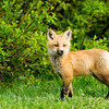 "Red Fox Kit © 2008 Nova Mackentley Whitefish Point, MI FKS  <div class=""ss-paypal-button""><div class=""ss-paypal-add-to-cart-section""><div class=""ss-paypal-product-options""><h4>Mat Sizes</h4><ul><li><a href=""https://www.paypal.com/cgi-bin/webscr?cmd=_cart&amp;business=T77V5VKCW4K2U&amp;lc=US&amp;item_name=Red%20Fox%20Kit%20%C2%A9%202008%20Nova%20Mackentley%20Whitefish%20Point%2C%20MI%20FKS&amp;item_number=http%3A%2F%2Fwww.nightflightimages.com%2FGalleries-1%2FMammals%2Fi-TDQ7kmd&amp;button_subtype=products&amp;no_note=0&amp;cn=Add%20special%20instructions%20to%20the%20seller%3A&amp;no_shipping=2&amp;currency_code=USD&amp;weight_unit=lbs&amp;add=1&amp;bn=PP-ShopCartBF%3Abtn_cart_SM.gif%3ANonHosted&amp;on0=Mat%20Sizes&amp;option_select0=5%20x%207&amp;option_amount0=10.00&amp;option_select1=8%20x%2010&amp;option_amount1=18.00&amp;option_select2=11%20x%2014&amp;option_amount2=28.00&amp;option_select3=card&amp;option_amount3=4.00&amp;option_index=0&amp;charset=utf-8&amp;submit=&amp;os0=5%20x%207"" target=""paypal""><span>5 x 7 $11.00 USD</span><img src=""https://www.paypalobjects.com/en_US/i/btn/btn_cart_SM.gif""></a></li><li><a href=""https://www.paypal.com/cgi-bin/webscr?cmd=_cart&amp;business=T77V5VKCW4K2U&amp;lc=US&amp;item_name=Red%20Fox%20Kit%20%C2%A9%202008%20Nova%20Mackentley%20Whitefish%20Point%2C%20MI%20FKS&amp;item_number=http%3A%2F%2Fwww.nightflightimages.com%2FGalleries-1%2FMammals%2Fi-TDQ7kmd&amp;button_subtype=products&amp;no_note=0&amp;cn=Add%20special%20instructions%20to%20the%20seller%3A&amp;no_shipping=2&amp;currency_code=USD&amp;weight_unit=lbs&amp;add=1&amp;bn=PP-ShopCartBF%3Abtn_cart_SM.gif%3ANonHosted&amp;on0=Mat%20Sizes&amp;option_select0=5%20x%207&amp;option_amount0=10.00&amp;option_select1=8%20x%2010&amp;option_amount1=18.00&amp;option_select2=11%20x%2014&amp;option_amount2=28.00&amp;option_select3=card&amp;option_amount3=4.00&amp;option_index=0&amp;charset=utf-8&amp;submit=&amp;os0=8%20x%2010"" target=""paypal""><span>8 x 10 $19.00 USD</span><img src=""https://www.paypalobjects.com/en_US/i/btn/btn_cart_SM.gif""></a></li><li><a href=""https://www.paypal.com/cgi-bin/webscr?cmd=_cart&amp;business=T77V5VKCW4K2U&amp;lc=US&amp;item_name=Red%20Fox%20Kit%20%C2%A9%202008%20Nova%20Mackentley%20Whitefish%20Point%2C%20MI%20FKS&amp;item_number=http%3A%2F%2Fwww.nightflightimages.com%2FGalleries-1%2FMammals%2Fi-TDQ7kmd&amp;button_subtype=products&amp;no_note=0&amp;cn=Add%20special%20instructions%20to%20the%20seller%3A&amp;no_shipping=2&amp;currency_code=USD&amp;weight_unit=lbs&amp;add=1&amp;bn=PP-ShopCartBF%3Abtn_cart_SM.gif%3ANonHosted&amp;on0=Mat%20Sizes&amp;option_select0=5%20x%207&amp;option_amount0=10.00&amp;option_select1=8%20x%2010&amp;option_amount1=18.00&amp;option_select2=11%20x%2014&amp;option_amount2=28.00&amp;option_select3=card&amp;option_amount3=4.00&amp;option_index=0&amp;charset=utf-8&amp;submit=&amp;os0=11%20x%2014"" target=""paypal""><span>11 x 14 $29.00 USD</span><img src=""https://www.paypalobjects.com/en_US/i/btn/btn_cart_SM.gif""></a></li><li><a href=""https://www.paypal.com/cgi-bin/webscr?cmd=_cart&amp;business=T77V5VKCW4K2U&amp;lc=US&amp;item_name=Red%20Fox%20Kit%20%C2%A9%202008%20Nova%20Mackentley%20Whitefish%20Point%2C%20MI%20FKS&amp;item_number=http%3A%2F%2Fwww.nightflightimages.com%2FGalleries-1%2FMammals%2Fi-TDQ7kmd&amp;button_subtype=products&amp;no_note=0&amp;cn=Add%20special%20instructions%20to%20the%20seller%3A&amp;no_shipping=2&amp;currency_code=USD&amp;weight_unit=lbs&amp;add=1&amp;bn=PP-ShopCartBF%3Abtn_cart_SM.gif%3ANonHosted&amp;on0=Mat%20Sizes&amp;option_select0=5%20x%207&amp;option_amount0=10.00&amp;option_select1=8%20x%2010&amp;option_amount1=18.00&amp;option_select2=11%20x%2014&amp;option_amount2=28.00&amp;option_select3=card&amp;option_amount3=4.00&amp;option_index=0&amp;charset=utf-8&amp;submit=&amp;os0=card"" target=""paypal""><span>card $5.00 USD</span><img src=""https://www.paypalobjects.com/en_US/i/btn/btn_cart_SM.gif""></a></li></ul></div></div> <div class=""ss-paypal-view-cart-section""><a href=""https://www.paypal.com/cgi-bin/webscr?cmd=_cart&amp;business=T77V5VKCW4K2U&amp;display=1&amp;item_name=Red%20Fox%20Kit%20%C2%A9%202008%20Nova%20Mackentley%20Whitefish%20Point%2C%20MI%20FKS&amp;item_number=http%3A%2F%2Fwww.nightflightimages.com%2FGalleries-1%2FMammals%2Fi-TDQ7kmd&amp;charset=utf-8&amp;submit="" target=""paypal"" class=""ss-paypal-submit-button""><img src=""https://www.paypalobjects.com/en_US/i/btn/btn_viewcart_LG.gif""></a></div></div><div class=""ss-paypal-button-end""></div>"