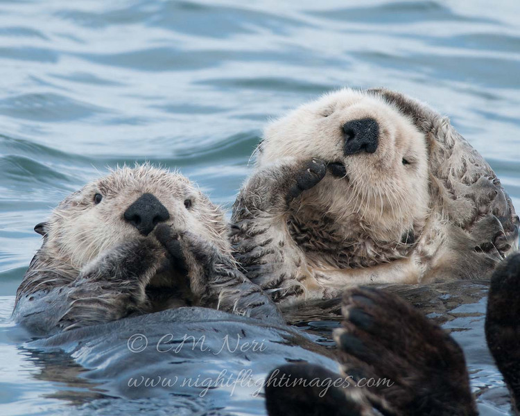 """Sea Otter © 2010 C. M. Neri.  Moss Landing, CA SEOT  <div class=""""ss-paypal-button""""><div class=""""ss-paypal-add-to-cart-section""""><div class=""""ss-paypal-product-options""""><h4>Mat Sizes</h4><ul><li><a href=""""https://www.paypal.com/cgi-bin/webscr?cmd=_cart&amp;business=T77V5VKCW4K2U&amp;lc=US&amp;item_name=Sea%20Otter%20%C2%A9%202010%20C.%20M.%20Neri.%20%20Moss%20Landing%2C%20CA%20SEOT&amp;item_number=http%3A%2F%2Fwww.nightflightimages.com%2FGalleries-1%2FTravels%2Fi-TrbrQJF&amp;button_subtype=products&amp;no_note=0&amp;cn=Add%20special%20instructions%20to%20the%20seller%3A&amp;no_shipping=2&amp;currency_code=USD&amp;weight_unit=lbs&amp;add=1&amp;bn=PP-ShopCartBF%3Abtn_cart_SM.gif%3ANonHosted&amp;on0=Mat%20Sizes&amp;option_select0=5%20x%207&amp;option_amount0=10.00&amp;option_select1=8%20x%2010&amp;option_amount1=18.00&amp;option_select2=11%20x%2014&amp;option_amount2=28.00&amp;option_select3=card&amp;option_amount3=4.00&amp;option_index=0&amp;charset=utf-8&amp;submit=&amp;os0=5%20x%207"""" target=""""paypal""""><span>5 x 7 $11.00 USD</span><img src=""""https://www.paypalobjects.com/en_US/i/btn/btn_cart_SM.gif""""></a></li><li><a href=""""https://www.paypal.com/cgi-bin/webscr?cmd=_cart&amp;business=T77V5VKCW4K2U&amp;lc=US&amp;item_name=Sea%20Otter%20%C2%A9%202010%20C.%20M.%20Neri.%20%20Moss%20Landing%2C%20CA%20SEOT&amp;item_number=http%3A%2F%2Fwww.nightflightimages.com%2FGalleries-1%2FTravels%2Fi-TrbrQJF&amp;button_subtype=products&amp;no_note=0&amp;cn=Add%20special%20instructions%20to%20the%20seller%3A&amp;no_shipping=2&amp;currency_code=USD&amp;weight_unit=lbs&amp;add=1&amp;bn=PP-ShopCartBF%3Abtn_cart_SM.gif%3ANonHosted&amp;on0=Mat%20Sizes&amp;option_select0=5%20x%207&amp;option_amount0=10.00&amp;option_select1=8%20x%2010&amp;option_amount1=18.00&amp;option_select2=11%20x%2014&amp;option_amount2=28.00&amp;option_select3=card&amp;option_amount3=4.00&amp;option_index=0&amp;charset=utf-8&amp;submit=&amp;os0=8%20x%2010"""" target=""""paypal""""><span>8 x 10 $19.00 USD</span><img src=""""https://www.paypalo"""