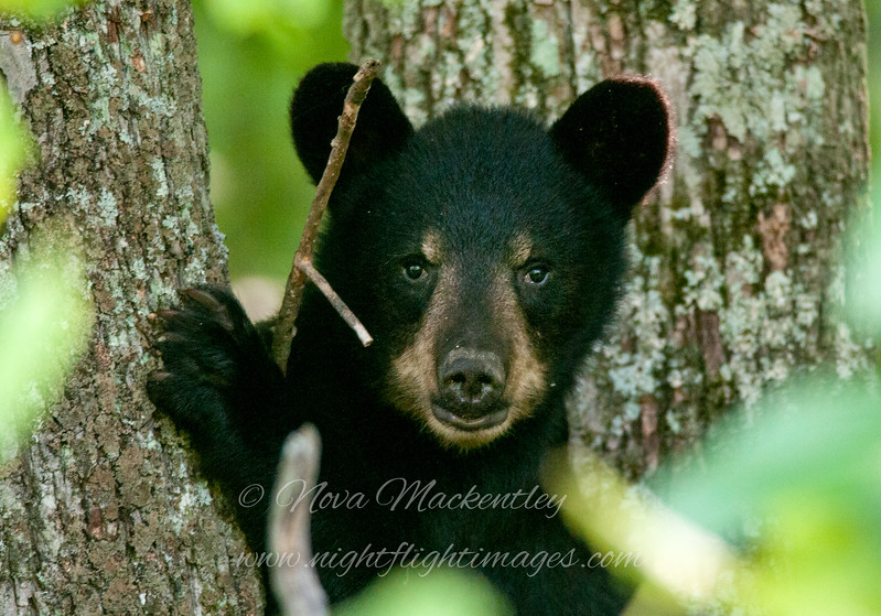 "Bear cub face © 2015 Nova Mackentley, Somewhere in WI.  BCF  <div class=""ss-paypal-button""><div class=""ss-paypal-add-to-cart-section""><div class=""ss-paypal-product-options""><h4>Mat Sizes</h4><ul><li><a href=""https://www.paypal.com/cgi-bin/webscr?cmd=_cart&amp;business=T77V5VKCW4K2U&amp;lc=US&amp;item_name=Bear%20cub%20face%20%C2%A9%202015%20Nova%20Mackentley%2C%20Somewhere%20in%20WI.%20%20BCF&amp;item_number=http%3A%2F%2Fwww.nightflightimages.com%2FGalleries-1%2FMammals%2Fi-TszJqD2&amp;button_subtype=products&amp;no_note=0&amp;cn=Add%20special%20instructions%20to%20the%20seller%3A&amp;no_shipping=2&amp;currency_code=USD&amp;weight_unit=lbs&amp;add=1&amp;bn=PP-ShopCartBF%3Abtn_cart_SM.gif%3ANonHosted&amp;on0=Mat%20Sizes&amp;option_select0=5%20x%207&amp;option_amount0=10.00&amp;option_select1=8%20x%2010&amp;option_amount1=18.00&amp;option_select2=11%20x%2014&amp;option_amount2=28.00&amp;option_select3=card&amp;option_amount3=4.00&amp;option_index=0&amp;charset=utf-8&amp;submit=&amp;os0=5%20x%207"" target=""paypal""><span>5 x 7 $11.00 USD</span><img src=""https://www.paypalobjects.com/en_US/i/btn/btn_cart_SM.gif""></a></li><li><a href=""https://www.paypal.com/cgi-bin/webscr?cmd=_cart&amp;business=T77V5VKCW4K2U&amp;lc=US&amp;item_name=Bear%20cub%20face%20%C2%A9%202015%20Nova%20Mackentley%2C%20Somewhere%20in%20WI.%20%20BCF&amp;item_number=http%3A%2F%2Fwww.nightflightimages.com%2FGalleries-1%2FMammals%2Fi-TszJqD2&amp;button_subtype=products&amp;no_note=0&amp;cn=Add%20special%20instructions%20to%20the%20seller%3A&amp;no_shipping=2&amp;currency_code=USD&amp;weight_unit=lbs&amp;add=1&amp;bn=PP-ShopCartBF%3Abtn_cart_SM.gif%3ANonHosted&amp;on0=Mat%20Sizes&amp;option_select0=5%20x%207&amp;option_amount0=10.00&amp;option_select1=8%20x%2010&amp;option_amount1=18.00&amp;option_select2=11%20x%2014&amp;option_amount2=28.00&amp;option_select3=card&amp;option_amount3=4.00&amp;option_index=0&amp;charset=utf-8&amp;submit=&amp;os0=8%20x%2010"" target=""paypal""><span>8 x 10 $19.00 USD</span><img src=""https://www.paypalobjects.com/en_US/i/btn/btn_cart_SM.gif""></a></li><li><a href=""https://www.paypal.com/cgi-bin/webscr?cmd=_cart&amp;business=T77V5VKCW4K2U&amp;lc=US&amp;item_name=Bear%20cub%20face%20%C2%A9%202015%20Nova%20Mackentley%2C%20Somewhere%20in%20WI.%20%20BCF&amp;item_number=http%3A%2F%2Fwww.nightflightimages.com%2FGalleries-1%2FMammals%2Fi-TszJqD2&amp;button_subtype=products&amp;no_note=0&amp;cn=Add%20special%20instructions%20to%20the%20seller%3A&amp;no_shipping=2&amp;currency_code=USD&amp;weight_unit=lbs&amp;add=1&amp;bn=PP-ShopCartBF%3Abtn_cart_SM.gif%3ANonHosted&amp;on0=Mat%20Sizes&amp;option_select0=5%20x%207&amp;option_amount0=10.00&amp;option_select1=8%20x%2010&amp;option_amount1=18.00&amp;option_select2=11%20x%2014&amp;option_amount2=28.00&amp;option_select3=card&amp;option_amount3=4.00&amp;option_index=0&amp;charset=utf-8&amp;submit=&amp;os0=11%20x%2014"" target=""paypal""><span>11 x 14 $29.00 USD</span><img src=""https://www.paypalobjects.com/en_US/i/btn/btn_cart_SM.gif""></a></li><li><a href=""https://www.paypal.com/cgi-bin/webscr?cmd=_cart&amp;business=T77V5VKCW4K2U&amp;lc=US&amp;item_name=Bear%20cub%20face%20%C2%A9%202015%20Nova%20Mackentley%2C%20Somewhere%20in%20WI.%20%20BCF&amp;item_number=http%3A%2F%2Fwww.nightflightimages.com%2FGalleries-1%2FMammals%2Fi-TszJqD2&amp;button_subtype=products&amp;no_note=0&amp;cn=Add%20special%20instructions%20to%20the%20seller%3A&amp;no_shipping=2&amp;currency_code=USD&amp;weight_unit=lbs&amp;add=1&amp;bn=PP-ShopCartBF%3Abtn_cart_SM.gif%3ANonHosted&amp;on0=Mat%20Sizes&amp;option_select0=5%20x%207&amp;option_amount0=10.00&amp;option_select1=8%20x%2010&amp;option_amount1=18.00&amp;option_select2=11%20x%2014&amp;option_amount2=28.00&amp;option_select3=card&amp;option_amount3=4.00&amp;option_index=0&amp;charset=utf-8&amp;submit=&amp;os0=card"" target=""paypal""><span>card $5.00 USD</span><img src=""https://www.paypalobjects.com/en_US/i/btn/btn_cart_SM.gif""></a></li></ul></div></div> <div class=""ss-paypal-view-cart-section""><a href=""https://www.paypal.com/cgi-bin/webscr?cmd=_cart&amp;business=T77V5VKCW4K2U&amp;display=1&amp;item_name=Bear%20cub%20face%20%C2%A9%202015%20Nova%20Mackentley%2C%20Somewhere%20in%20WI.%20%20BCF&amp;item_number=http%3A%2F%2Fwww.nightflightimages.com%2FGalleries-1%2FMammals%2Fi-TszJqD2&amp;charset=utf-8&amp;submit="" target=""paypal"" class=""ss-paypal-submit-button""><img src=""https://www.paypalobjects.com/en_US/i/btn/btn_viewcart_LG.gif""></a></div></div><div class=""ss-paypal-button-end""></div>"