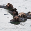 "Sea Otter © 2010 C. M. Neri.  Moss Landing, CA SEOT2  <div class=""ss-paypal-button""><div class=""ss-paypal-add-to-cart-section""><div class=""ss-paypal-product-options""><h4>Mat Sizes</h4><ul><li><a href=""https://www.paypal.com/cgi-bin/webscr?cmd=_cart&amp;business=T77V5VKCW4K2U&amp;lc=US&amp;item_name=Sea%20Otter%20%C2%A9%202010%20C.%20M.%20Neri.%20%20Moss%20Landing%2C%20CA%20SEOT2&amp;item_number=http%3A%2F%2Fwww.nightflightimages.com%2FGalleries-1%2FTravels%2Fi-XHwb7jL&amp;button_subtype=products&amp;no_note=0&amp;cn=Add%20special%20instructions%20to%20the%20seller%3A&amp;no_shipping=2&amp;currency_code=USD&amp;weight_unit=lbs&amp;add=1&amp;bn=PP-ShopCartBF%3Abtn_cart_SM.gif%3ANonHosted&amp;on0=Mat%20Sizes&amp;option_select0=5%20x%207&amp;option_amount0=10.00&amp;option_select1=8%20x%2010&amp;option_amount1=18.00&amp;option_select2=11%20x%2014&amp;option_amount2=28.00&amp;option_select3=card&amp;option_amount3=4.00&amp;option_index=0&amp;charset=utf-8&amp;submit=&amp;os0=5%20x%207"" target=""paypal""><span>5 x 7 $11.00 USD</span><img src=""https://www.paypalobjects.com/en_US/i/btn/btn_cart_SM.gif""></a></li><li><a href=""https://www.paypal.com/cgi-bin/webscr?cmd=_cart&amp;business=T77V5VKCW4K2U&amp;lc=US&amp;item_name=Sea%20Otter%20%C2%A9%202010%20C.%20M.%20Neri.%20%20Moss%20Landing%2C%20CA%20SEOT2&amp;item_number=http%3A%2F%2Fwww.nightflightimages.com%2FGalleries-1%2FTravels%2Fi-XHwb7jL&amp;button_subtype=products&amp;no_note=0&amp;cn=Add%20special%20instructions%20to%20the%20seller%3A&amp;no_shipping=2&amp;currency_code=USD&amp;weight_unit=lbs&amp;add=1&amp;bn=PP-ShopCartBF%3Abtn_cart_SM.gif%3ANonHosted&amp;on0=Mat%20Sizes&amp;option_select0=5%20x%207&amp;option_amount0=10.00&amp;option_select1=8%20x%2010&amp;option_amount1=18.00&amp;option_select2=11%20x%2014&amp;option_amount2=28.00&amp;option_select3=card&amp;option_amount3=4.00&amp;option_index=0&amp;charset=utf-8&amp;submit=&amp;os0=8%20x%2010"" target=""paypal""><span>8 x 10 $19.00 USD</span><img src=""https://www.paypalobjects.com/en_US/i/btn/btn_cart_SM.gif""></a></li><li><a href=""https://www.paypal.com/cgi-bin/webscr?cmd=_cart&amp;business=T77V5VKCW4K2U&amp;lc=US&amp;item_name=Sea%20Otter%20%C2%A9%202010%20C.%20M.%20Neri.%20%20Moss%20Landing%2C%20CA%20SEOT2&amp;item_number=http%3A%2F%2Fwww.nightflightimages.com%2FGalleries-1%2FTravels%2Fi-XHwb7jL&amp;button_subtype=products&amp;no_note=0&amp;cn=Add%20special%20instructions%20to%20the%20seller%3A&amp;no_shipping=2&amp;currency_code=USD&amp;weight_unit=lbs&amp;add=1&amp;bn=PP-ShopCartBF%3Abtn_cart_SM.gif%3ANonHosted&amp;on0=Mat%20Sizes&amp;option_select0=5%20x%207&amp;option_amount0=10.00&amp;option_select1=8%20x%2010&amp;option_amount1=18.00&amp;option_select2=11%20x%2014&amp;option_amount2=28.00&amp;option_select3=card&amp;option_amount3=4.00&amp;option_index=0&amp;charset=utf-8&amp;submit=&amp;os0=11%20x%2014"" target=""paypal""><span>11 x 14 $29.00 USD</span><img src=""https://www.paypalobjects.com/en_US/i/btn/btn_cart_SM.gif""></a></li><li><a href=""https://www.paypal.com/cgi-bin/webscr?cmd=_cart&amp;business=T77V5VKCW4K2U&amp;lc=US&amp;item_name=Sea%20Otter%20%C2%A9%202010%20C.%20M.%20Neri.%20%20Moss%20Landing%2C%20CA%20SEOT2&amp;item_number=http%3A%2F%2Fwww.nightflightimages.com%2FGalleries-1%2FTravels%2Fi-XHwb7jL&amp;button_subtype=products&amp;no_note=0&amp;cn=Add%20special%20instructions%20to%20the%20seller%3A&amp;no_shipping=2&amp;currency_code=USD&amp;weight_unit=lbs&amp;add=1&amp;bn=PP-ShopCartBF%3Abtn_cart_SM.gif%3ANonHosted&amp;on0=Mat%20Sizes&amp;option_select0=5%20x%207&amp;option_amount0=10.00&amp;option_select1=8%20x%2010&amp;option_amount1=18.00&amp;option_select2=11%20x%2014&amp;option_amount2=28.00&amp;option_select3=card&amp;option_amount3=4.00&amp;option_index=0&amp;charset=utf-8&amp;submit=&amp;os0=card"" target=""paypal""><span>card $5.00 USD</span><img src=""https://www.paypalobjects.com/en_US/i/btn/btn_cart_SM.gif""></a></li></ul></div></div> <div class=""ss-paypal-view-cart-section""><a href=""https://www.paypal.com/cgi-bin/webscr?cmd=_cart&amp;business=T77V5VKCW4K2U&amp;display=1&amp;item_name=Sea%20Otter%20%C2%A9%202010%20C.%20M.%20Neri.%20%20Moss%20Landing%2C%20CA%20SEOT2&amp;item_number=http%3A%2F%2Fwww.nightflightimages.com%2FGalleries-1%2FTravels%2Fi-XHwb7jL&amp;charset=utf-8&amp;submit="" target=""paypal"" class=""ss-paypal-submit-button""><img src=""https://www.paypalobjects.com/en_US/i/btn/btn_viewcart_LG.gif""></a></div></div><div class=""ss-paypal-button-end""></div>"