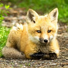 """Red Fox Kit © 2008 Nova Mackentley Whitefish Point, MI FKL  <div class=""""ss-paypal-button""""><div class=""""ss-paypal-add-to-cart-section""""><div class=""""ss-paypal-product-options""""><h4>Mat Sizes</h4><ul><li><a href=""""https://www.paypal.com/cgi-bin/webscr?cmd=_cart&amp;business=T77V5VKCW4K2U&amp;lc=US&amp;item_name=Red%20Fox%20Kit%20%C2%A9%202008%20Nova%20Mackentley%20Whitefish%20Point%2C%20MI%20FKL&amp;item_number=http%3A%2F%2Fwww.nightflightimages.com%2FGalleries-1%2FMammals%2Fi-ZgvBrJQ&amp;button_subtype=products&amp;no_note=0&amp;cn=Add%20special%20instructions%20to%20the%20seller%3A&amp;no_shipping=2&amp;currency_code=USD&amp;weight_unit=lbs&amp;add=1&amp;bn=PP-ShopCartBF%3Abtn_cart_SM.gif%3ANonHosted&amp;on0=Mat%20Sizes&amp;option_select0=5%20x%207&amp;option_amount0=10.00&amp;option_select1=8%20x%2010&amp;option_amount1=18.00&amp;option_select2=11%20x%2014&amp;option_amount2=28.00&amp;option_select3=card&amp;option_amount3=4.00&amp;option_index=0&amp;charset=utf-8&amp;submit=&amp;os0=5%20x%207"""" target=""""paypal""""><span>5 x 7 $11.00 USD</span><img src=""""https://www.paypalobjects.com/en_US/i/btn/btn_cart_SM.gif""""></a></li><li><a href=""""https://www.paypal.com/cgi-bin/webscr?cmd=_cart&amp;business=T77V5VKCW4K2U&amp;lc=US&amp;item_name=Red%20Fox%20Kit%20%C2%A9%202008%20Nova%20Mackentley%20Whitefish%20Point%2C%20MI%20FKL&amp;item_number=http%3A%2F%2Fwww.nightflightimages.com%2FGalleries-1%2FMammals%2Fi-ZgvBrJQ&amp;button_subtype=products&amp;no_note=0&amp;cn=Add%20special%20instructions%20to%20the%20seller%3A&amp;no_shipping=2&amp;currency_code=USD&amp;weight_unit=lbs&amp;add=1&amp;bn=PP-ShopCartBF%3Abtn_cart_SM.gif%3ANonHosted&amp;on0=Mat%20Sizes&amp;option_select0=5%20x%207&amp;option_amount0=10.00&amp;option_select1=8%20x%2010&amp;option_amount1=18.00&amp;option_select2=11%20x%2014&amp;option_amount2=28.00&amp;option_select3=card&amp;option_amount3=4.00&amp;option_index=0&amp;charset=utf-8&amp;submit=&amp;os0=8%20x%2010"""" target=""""paypal""""><span>8 x 10 $19.00 USD</span><img src=""""ht"""