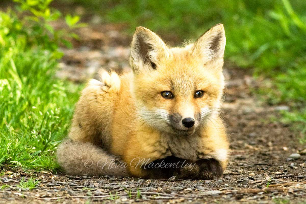 """Red Fox Kit © 2008 Nova Mackentley Whitefish Point, MI FKL  <div class=""""ss-paypal-button""""><div class=""""ss-paypal-add-to-cart-section""""><div class=""""ss-paypal-product-options""""><h4>Mat Sizes</h4><ul><li><a href=""""https://www.paypal.com/cgi-bin/webscr?cmd=_cart&business=T77V5VKCW4K2U&lc=US&item_name=Red%20Fox%20Kit%20%C2%A9%202008%20Nova%20Mackentley%20Whitefish%20Point%2C%20MI%20FKL&item_number=http%3A%2F%2Fwww.nightflightimages.com%2FGalleries-1%2FMammals%2Fi-ZgvBrJQ&button_subtype=products&no_note=0&cn=Add%20special%20instructions%20to%20the%20seller%3A&no_shipping=2&currency_code=USD&weight_unit=lbs&add=1&bn=PP-ShopCartBF%3Abtn_cart_SM.gif%3ANonHosted&on0=Mat%20Sizes&option_select0=5%20x%207&option_amount0=10.00&option_select1=8%20x%2010&option_amount1=18.00&option_select2=11%20x%2014&option_amount2=28.00&option_select3=card&option_amount3=4.00&option_index=0&charset=utf-8&submit=&os0=5%20x%207"""" target=""""paypal""""><span>5 x 7 $11.00 USD</span><img src=""""https://www.paypalobjects.com/en_US/i/btn/btn_cart_SM.gif""""></a></li><li><a href=""""https://www.paypal.com/cgi-bin/webscr?cmd=_cart&business=T77V5VKCW4K2U&lc=US&item_name=Red%20Fox%20Kit%20%C2%A9%202008%20Nova%20Mackentley%20Whitefish%20Point%2C%20MI%20FKL&item_number=http%3A%2F%2Fwww.nightflightimages.com%2FGalleries-1%2FMammals%2Fi-ZgvBrJQ&button_subtype=products&no_note=0&cn=Add%20special%20instructions%20to%20the%20seller%3A&no_shipping=2&currency_code=USD&weight_unit=lbs&add=1&bn=PP-ShopCartBF%3Abtn_cart_SM.gif%3ANonHosted&on0=Mat%20Sizes&option_select0=5%20x%207&option_amount0=10.00&option_select1=8%20x%2010&option_amount1=18.00&option_select2=11%20x%2014&option_amount2=28.00&option_select3=card&option_amount3=4.00&option_index=0&charset=utf-8&submit=&os0=8%20x%2010"""" target=""""paypal""""><span>8 x 10 $19.00 USD</span><img src=""""https://www.paypalobjects.com/en_US/i/btn/btn_cart_SM.gif""""></a></li><li><a href=""""https://www.paypal.com/cgi-bin/webscr?cmd=_cart&business=T77V5VKCW4K2U&lc=US&item_name=Red%20Fox%20Kit%20%C2%A9%202008%20"""