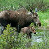 """Moose with baby © 2009 Nova Mackentley Rocky Mtn NP, CO MWB  <div class=""""ss-paypal-button""""><div class=""""ss-paypal-add-to-cart-section""""><div class=""""ss-paypal-product-options""""><h4>Mat Sizes</h4><ul><li><a href=""""https://www.paypal.com/cgi-bin/webscr?cmd=_cart&business=T77V5VKCW4K2U&lc=US&item_name=Moose%20with%20baby%20%C2%A9%202009%20Nova%20Mackentley%20Rocky%20Mtn%20NP%2C%20CO%20MWB&item_number=http%3A%2F%2Fwww.nightflightimages.com%2FGalleries-1%2FTravels%2Fi-cKpLXzR&button_subtype=products&no_note=0&cn=Add%20special%20instructions%20to%20the%20seller%3A&no_shipping=2&currency_code=USD&weight_unit=lbs&add=1&bn=PP-ShopCartBF%3Abtn_cart_SM.gif%3ANonHosted&on0=Mat%20Sizes&option_select0=5%20x%207&option_amount0=10.00&option_select1=8%20x%2010&option_amount1=18.00&option_select2=11%20x%2014&option_amount2=28.00&option_select3=card&option_amount3=4.00&option_index=0&charset=utf-8&submit=&os0=5%20x%207"""" target=""""paypal""""><span>5 x 7 $11.00 USD</span><img src=""""https://www.paypalobjects.com/en_US/i/btn/btn_cart_SM.gif""""></a></li><li><a href=""""https://www.paypal.com/cgi-bin/webscr?cmd=_cart&business=T77V5VKCW4K2U&lc=US&item_name=Moose%20with%20baby%20%C2%A9%202009%20Nova%20Mackentley%20Rocky%20Mtn%20NP%2C%20CO%20MWB&item_number=http%3A%2F%2Fwww.nightflightimages.com%2FGalleries-1%2FTravels%2Fi-cKpLXzR&button_subtype=products&no_note=0&cn=Add%20special%20instructions%20to%20the%20seller%3A&no_shipping=2&currency_code=USD&weight_unit=lbs&add=1&bn=PP-ShopCartBF%3Abtn_cart_SM.gif%3ANonHosted&on0=Mat%20Sizes&option_select0=5%20x%207&option_amount0=10.00&option_select1=8%20x%2010&option_amount1=18.00&option_select2=11%20x%2014&option_amount2=28.00&option_select3=card&option_amount3=4.00&option_index=0&charset=utf-8&submit=&os0=8%20x%2010"""" target=""""paypal""""><span>8 x 10 $19.00 USD</span><img src=""""https://www.paypalobjects.com/en_US/i/btn/btn_cart_SM.gif""""></a></li><li><a href=""""https://www.paypal.com/cgi-bin/webscr?cmd=_cart&business=T77V5VKCW4K2U&lc=US&item_name=Moose%20with%20baby%20%C2%A"""