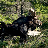 """Moose © 2009 C. M. Neri.  Whitefish Point, MI MOOSEWP  <div class=""""ss-paypal-button""""><div class=""""ss-paypal-add-to-cart-section""""><div class=""""ss-paypal-product-options""""><h4>Mat Sizes</h4><ul><li><a href=""""https://www.paypal.com/cgi-bin/webscr?cmd=_cart&amp;business=T77V5VKCW4K2U&amp;lc=US&amp;item_name=Moose%20%C2%A9%202009%20C.%20M.%20Neri.%20%20Whitefish%20Point%2C%20MI%20MOOSEWP&amp;item_number=http%3A%2F%2Fwww.nightflightimages.com%2FGalleries-1%2FMammals%2Fi-cbxpD3W&amp;button_subtype=products&amp;no_note=0&amp;cn=Add%20special%20instructions%20to%20the%20seller%3A&amp;no_shipping=2&amp;currency_code=USD&amp;weight_unit=lbs&amp;add=1&amp;bn=PP-ShopCartBF%3Abtn_cart_SM.gif%3ANonHosted&amp;on0=Mat%20Sizes&amp;option_select0=5%20x%207&amp;option_amount0=10.00&amp;option_select1=8%20x%2010&amp;option_amount1=18.00&amp;option_select2=11%20x%2014&amp;option_amount2=28.00&amp;option_select3=card&amp;option_amount3=4.00&amp;option_index=0&amp;charset=utf-8&amp;submit=&amp;os0=5%20x%207"""" target=""""paypal""""><span>5 x 7 $11.00 USD</span><img src=""""https://www.paypalobjects.com/en_US/i/btn/btn_cart_SM.gif""""></a></li><li><a href=""""https://www.paypal.com/cgi-bin/webscr?cmd=_cart&amp;business=T77V5VKCW4K2U&amp;lc=US&amp;item_name=Moose%20%C2%A9%202009%20C.%20M.%20Neri.%20%20Whitefish%20Point%2C%20MI%20MOOSEWP&amp;item_number=http%3A%2F%2Fwww.nightflightimages.com%2FGalleries-1%2FMammals%2Fi-cbxpD3W&amp;button_subtype=products&amp;no_note=0&amp;cn=Add%20special%20instructions%20to%20the%20seller%3A&amp;no_shipping=2&amp;currency_code=USD&amp;weight_unit=lbs&amp;add=1&amp;bn=PP-ShopCartBF%3Abtn_cart_SM.gif%3ANonHosted&amp;on0=Mat%20Sizes&amp;option_select0=5%20x%207&amp;option_amount0=10.00&amp;option_select1=8%20x%2010&amp;option_amount1=18.00&amp;option_select2=11%20x%2014&amp;option_amount2=28.00&amp;option_select3=card&amp;option_amount3=4.00&amp;option_index=0&amp;charset=utf-8&amp;submit=&amp;os0=8%20x%2010"""" target=""""paypal""""><span>8 x 10 $19.00 USD</span><img src=""""https://www.paypa"""