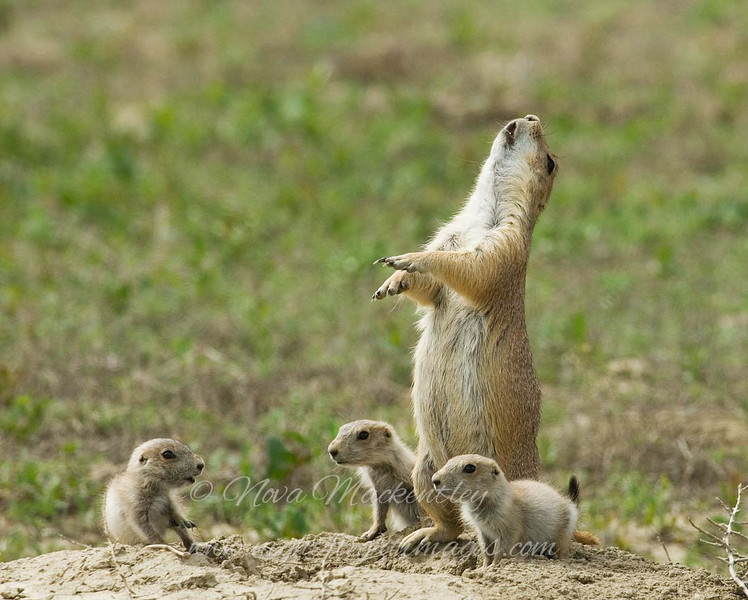 "Prairie Dog Family © 2008 Nova Mackentley Teddy Roosevelt NP, ND PDF  <div class=""ss-paypal-button""><div class=""ss-paypal-add-to-cart-section""><div class=""ss-paypal-product-options""><h4>Mat Sizes</h4><ul><li><a href=""https://www.paypal.com/cgi-bin/webscr?cmd=_cart&business=T77V5VKCW4K2U&lc=US&item_name=Prairie%20Dog%20Family%20%C2%A9%202008%20Nova%20Mackentley%20Teddy%20Roosevelt%20NP%2C%20ND%20PDF&item_number=http%3A%2F%2Fwww.nightflightimages.com%2FGalleries-1%2FTravels%2Fi-fJWp5vx&button_subtype=products&no_note=0&cn=Add%20special%20instructions%20to%20the%20seller%3A&no_shipping=2&currency_code=USD&weight_unit=lbs&add=1&bn=PP-ShopCartBF%3Abtn_cart_SM.gif%3ANonHosted&on0=Mat%20Sizes&option_select0=5%20x%207&option_amount0=10.00&option_select1=8%20x%2010&option_amount1=18.00&option_select2=11%20x%2014&option_amount2=28.00&option_select3=card&option_amount3=4.00&option_index=0&charset=utf-8&submit=&os0=5%20x%207"" target=""paypal""><span>5 x 7 $11.00 USD</span><img src=""https://www.paypalobjects.com/en_US/i/btn/btn_cart_SM.gif""></a></li><li><a href=""https://www.paypal.com/cgi-bin/webscr?cmd=_cart&business=T77V5VKCW4K2U&lc=US&item_name=Prairie%20Dog%20Family%20%C2%A9%202008%20Nova%20Mackentley%20Teddy%20Roosevelt%20NP%2C%20ND%20PDF&item_number=http%3A%2F%2Fwww.nightflightimages.com%2FGalleries-1%2FTravels%2Fi-fJWp5vx&button_subtype=products&no_note=0&cn=Add%20special%20instructions%20to%20the%20seller%3A&no_shipping=2&currency_code=USD&weight_unit=lbs&add=1&bn=PP-ShopCartBF%3Abtn_cart_SM.gif%3ANonHosted&on0=Mat%20Sizes&option_select0=5%20x%207&option_amount0=10.00&option_select1=8%20x%2010&option_amount1=18.00&option_select2=11%20x%2014&option_amount2=28.00&option_select3=card&option_amount3=4.00&option_index=0&charset=utf-8&submit=&os0=8%20x%2010"" target=""paypal""><span>8 x 10 $19.00 USD</span><img src=""https://www.paypalobjects.com/en_US/i/btn/btn_cart_SM.gif""></a></li><li><a href=""https://www.paypal.com/cgi-bin/webscr?cmd=_cart&business=T77V5VKCW4K2U&lc=US&item_name=Prairie%20Dog%20Family%20%C2%A9%202008%20Nova%20Mackentley%20Teddy%20Roosevelt%20NP%2C%20ND%20PDF&item_number=http%3A%2F%2Fwww.nightflightimages.com%2FGalleries-1%2FTravels%2Fi-fJWp5vx&button_subtype=products&no_note=0&cn=Add%20special%20instructions%20to%20the%20seller%3A&no_shipping=2&currency_code=USD&weight_unit=lbs&add=1&bn=PP-ShopCartBF%3Abtn_cart_SM.gif%3ANonHosted&on0=Mat%20Sizes&option_select0=5%20x%207&option_amount0=10.00&option_select1=8%20x%2010&option_amount1=18.00&option_select2=11%20x%2014&option_amount2=28.00&option_select3=card&option_amount3=4.00&option_index=0&charset=utf-8&submit=&os0=11%20x%2014"" target=""paypal""><span>11 x 14 $29.00 USD</span><img src=""https://www.paypalobjects.com/en_US/i/btn/btn_cart_SM.gif""></a></li><li><a href=""https://www.paypal.com/cgi-bin/webscr?cmd=_cart&business=T77V5VKCW4K2U&lc=US&item_name=Prairie%20Dog%20Family%20%C2%A9%202008%20Nova%20Mackentley%20Teddy%20Roosevelt%20NP%2C%20ND%20PDF&item_number=http%3A%2F%2Fwww.nightflightimages.com%2FGalleries-1%2FTravels%2Fi-fJWp5vx&button_subtype=products&no_note=0&cn=Add%20special%20instructions%20to%20the%20seller%3A&no_shipping=2&currency_code=USD&weight_unit=lbs&add=1&bn=PP-ShopCartBF%3Abtn_cart_SM.gif%3ANonHosted&on0=Mat%20Sizes&option_select0=5%20x%207&option_amount0=10.00&option_select1=8%20x%2010&option_amount1=18.00&option_select2=11%20x%2014&option_amount2=28.00&option_select3=card&option_amount3=4.00&option_index=0&charset=utf-8&submit=&os0=card"" target=""paypal""><span>card $5.00 USD</span><img src=""https://www.paypalobjects.com/en_US/i/btn/btn_cart_SM.gif""></a></li></ul></div></div> <div class=""ss-paypal-view-cart-section""><a href=""https://www.paypal.com/cgi-bin/webscr?cmd=_cart&business=T77V5VKCW4K2U&display=1&item_name=Prairie%20Dog%20Family%20%C2%A9%202008%20Nova%20Mackentley%20Teddy%20Roosevelt%20NP%2C%20ND%20PDF&item_number=http%3A%2F%2Fwww.nightflightimages.com%2FGalleries-1%2FTravels%2Fi-fJWp5vx&charset=utf-8&submit="" target=""paypal"" class=""ss-paypal-submit-button""><img src=""https://www.paypalobjects.com/en_US/i/btn/btn_viewcart_LG.gif""></a></div></div><div class=""ss-paypal-button-end""></div>"