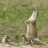 """Prairie Dog Family © 2008 Nova Mackentley Teddy Roosevelt NP, ND PDF  <div class=""""ss-paypal-button""""><div class=""""ss-paypal-add-to-cart-section""""><div class=""""ss-paypal-product-options""""><h4>Mat Sizes</h4><ul><li><a href=""""https://www.paypal.com/cgi-bin/webscr?cmd=_cart&business=T77V5VKCW4K2U&lc=US&item_name=Prairie%20Dog%20Family%20%C2%A9%202008%20Nova%20Mackentley%20Teddy%20Roosevelt%20NP%2C%20ND%20PDF&item_number=http%3A%2F%2Fwww.nightflightimages.com%2FGalleries-1%2FTravels%2Fi-fJWp5vx&button_subtype=products&no_note=0&cn=Add%20special%20instructions%20to%20the%20seller%3A&no_shipping=2&currency_code=USD&weight_unit=lbs&add=1&bn=PP-ShopCartBF%3Abtn_cart_SM.gif%3ANonHosted&on0=Mat%20Sizes&option_select0=5%20x%207&option_amount0=10.00&option_select1=8%20x%2010&option_amount1=18.00&option_select2=11%20x%2014&option_amount2=28.00&option_select3=card&option_amount3=4.00&option_index=0&charset=utf-8&submit=&os0=5%20x%207"""" target=""""paypal""""><span>5 x 7 $11.00 USD</span><img src=""""https://www.paypalobjects.com/en_US/i/btn/btn_cart_SM.gif""""></a></li><li><a href=""""https://www.paypal.com/cgi-bin/webscr?cmd=_cart&business=T77V5VKCW4K2U&lc=US&item_name=Prairie%20Dog%20Family%20%C2%A9%202008%20Nova%20Mackentley%20Teddy%20Roosevelt%20NP%2C%20ND%20PDF&item_number=http%3A%2F%2Fwww.nightflightimages.com%2FGalleries-1%2FTravels%2Fi-fJWp5vx&button_subtype=products&no_note=0&cn=Add%20special%20instructions%20to%20the%20seller%3A&no_shipping=2&currency_code=USD&weight_unit=lbs&add=1&bn=PP-ShopCartBF%3Abtn_cart_SM.gif%3ANonHosted&on0=Mat%20Sizes&option_select0=5%20x%207&option_amount0=10.00&option_select1=8%20x%2010&option_amount1=18.00&option_select2=11%20x%2014&option_amount2=28.00&option_select3=card&option_amount3=4.00&option_index=0&charset=utf-8&submit=&os0=8%20x%2010"""" target=""""paypal""""><span>8 x 10 $19.00 USD</span><img src=""""https://www.paypalobjects.com/en_US/i/btn/btn_cart_SM.gif""""></a></li><li><a href=""""https://www.paypal.com/cgi-bin/webscr?cmd=_cart&business=T77V5VKCW4K2U&lc=US&item_name="""