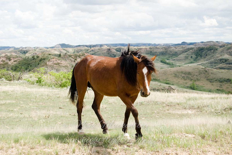 """Wild Stallion © 2008 Nova Mackentley Theodore Roosevelt NP, ND WHO  <div class=""""ss-paypal-button""""><div class=""""ss-paypal-add-to-cart-section""""><div class=""""ss-paypal-product-options""""><h4>Mat Sizes</h4><ul><li><a href=""""https://www.paypal.com/cgi-bin/webscr?cmd=_cart&amp;business=T77V5VKCW4K2U&amp;lc=US&amp;item_name=Wild%20Stallion%20%C2%A9%202008%20Nova%20Mackentley%20Theodore%20Roosevelt%20NP%2C%20ND%20WHO&amp;item_number=http%3A%2F%2Fwww.nightflightimages.com%2FGalleries-1%2FMammals%2Fi-fchW5mN&amp;button_subtype=products&amp;no_note=0&amp;cn=Add%20special%20instructions%20to%20the%20seller%3A&amp;no_shipping=2&amp;currency_code=USD&amp;weight_unit=lbs&amp;add=1&amp;bn=PP-ShopCartBF%3Abtn_cart_SM.gif%3ANonHosted&amp;on0=Mat%20Sizes&amp;option_select0=5%20x%207&amp;option_amount0=10.00&amp;option_select1=8%20x%2010&amp;option_amount1=18.00&amp;option_select2=11%20x%2014&amp;option_amount2=28.00&amp;option_select3=card&amp;option_amount3=4.00&amp;option_index=0&amp;charset=utf-8&amp;submit=&amp;os0=5%20x%207"""" target=""""paypal""""><span>5 x 7 $11.00 USD</span><img src=""""https://www.paypalobjects.com/en_US/i/btn/btn_cart_SM.gif""""></a></li><li><a href=""""https://www.paypal.com/cgi-bin/webscr?cmd=_cart&amp;business=T77V5VKCW4K2U&amp;lc=US&amp;item_name=Wild%20Stallion%20%C2%A9%202008%20Nova%20Mackentley%20Theodore%20Roosevelt%20NP%2C%20ND%20WHO&amp;item_number=http%3A%2F%2Fwww.nightflightimages.com%2FGalleries-1%2FMammals%2Fi-fchW5mN&amp;button_subtype=products&amp;no_note=0&amp;cn=Add%20special%20instructions%20to%20the%20seller%3A&amp;no_shipping=2&amp;currency_code=USD&amp;weight_unit=lbs&amp;add=1&amp;bn=PP-ShopCartBF%3Abtn_cart_SM.gif%3ANonHosted&amp;on0=Mat%20Sizes&amp;option_select0=5%20x%207&amp;option_amount0=10.00&amp;option_select1=8%20x%2010&amp;option_amount1=18.00&amp;option_select2=11%20x%2014&amp;option_amount2=28.00&amp;option_select3=card&amp;option_amount3=4.00&amp;option_index=0&amp;charset=utf-8&amp;submit=&amp;os0=8%20x%2010"""" target=""""paypal""""><span>8 x 10 $19.0"""