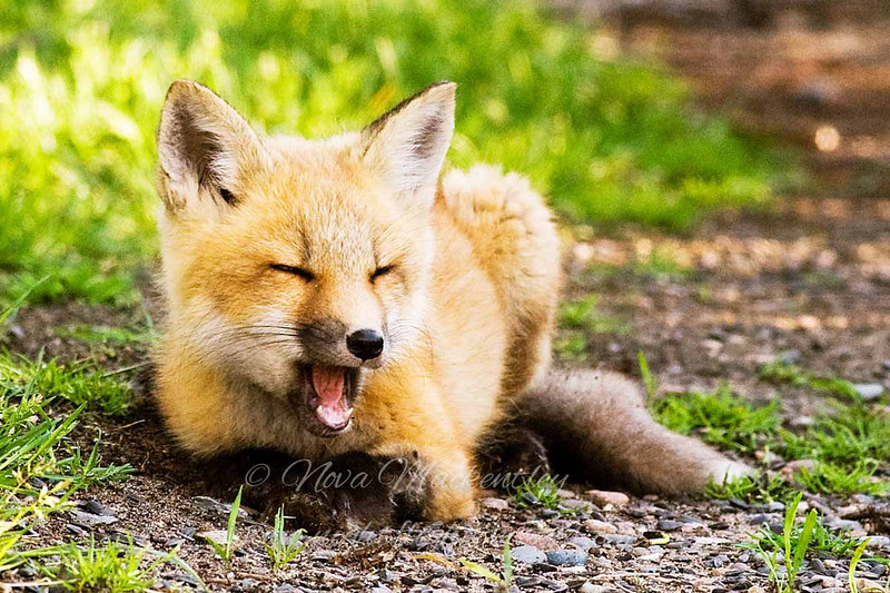 """Red Fox Kit © 2008 Nova Mackentley Whitefish Point, MI FKZ  <div class=""""ss-paypal-button""""><div class=""""ss-paypal-add-to-cart-section""""><div class=""""ss-paypal-product-options""""><h4>Mat Sizes</h4><ul><li><a href=""""https://www.paypal.com/cgi-bin/webscr?cmd=_cart&amp;business=T77V5VKCW4K2U&amp;lc=US&amp;item_name=Red%20Fox%20Kit%20%C2%A9%202008%20Nova%20Mackentley%20Whitefish%20Point%2C%20MI%20FKZ&amp;item_number=http%3A%2F%2Fwww.nightflightimages.com%2FGalleries-1%2FMammals%2Fi-g9LwQTj&amp;button_subtype=products&amp;no_note=0&amp;cn=Add%20special%20instructions%20to%20the%20seller%3A&amp;no_shipping=2&amp;currency_code=USD&amp;weight_unit=lbs&amp;add=1&amp;bn=PP-ShopCartBF%3Abtn_cart_SM.gif%3ANonHosted&amp;on0=Mat%20Sizes&amp;option_select0=5%20x%207&amp;option_amount0=10.00&amp;option_select1=8%20x%2010&amp;option_amount1=18.00&amp;option_select2=11%20x%2014&amp;option_amount2=28.00&amp;option_select3=card&amp;option_amount3=4.00&amp;option_index=0&amp;charset=utf-8&amp;submit=&amp;os0=5%20x%207"""" target=""""paypal""""><span>5 x 7 $11.00 USD</span><img src=""""https://www.paypalobjects.com/en_US/i/btn/btn_cart_SM.gif""""></a></li><li><a href=""""https://www.paypal.com/cgi-bin/webscr?cmd=_cart&amp;business=T77V5VKCW4K2U&amp;lc=US&amp;item_name=Red%20Fox%20Kit%20%C2%A9%202008%20Nova%20Mackentley%20Whitefish%20Point%2C%20MI%20FKZ&amp;item_number=http%3A%2F%2Fwww.nightflightimages.com%2FGalleries-1%2FMammals%2Fi-g9LwQTj&amp;button_subtype=products&amp;no_note=0&amp;cn=Add%20special%20instructions%20to%20the%20seller%3A&amp;no_shipping=2&amp;currency_code=USD&amp;weight_unit=lbs&amp;add=1&amp;bn=PP-ShopCartBF%3Abtn_cart_SM.gif%3ANonHosted&amp;on0=Mat%20Sizes&amp;option_select0=5%20x%207&amp;option_amount0=10.00&amp;option_select1=8%20x%2010&amp;option_amount1=18.00&amp;option_select2=11%20x%2014&amp;option_amount2=28.00&amp;option_select3=card&amp;option_amount3=4.00&amp;option_index=0&amp;charset=utf-8&amp;submit=&amp;os0=8%20x%2010"""" target=""""paypal""""><span>8 x 10 $19.00 USD</span><img src=""""ht"""