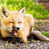 "Red Fox Kit © 2008 Nova Mackentley Whitefish Point, MI FKZ  <div class=""ss-paypal-button""><div class=""ss-paypal-add-to-cart-section""><div class=""ss-paypal-product-options""><h4>Mat Sizes</h4><ul><li><a href=""https://www.paypal.com/cgi-bin/webscr?cmd=_cart&business=T77V5VKCW4K2U&lc=US&item_name=Red%20Fox%20Kit%20%C2%A9%202008%20Nova%20Mackentley%20Whitefish%20Point%2C%20MI%20FKZ&item_number=http%3A%2F%2Fwww.nightflightimages.com%2FGalleries-1%2FMammals%2Fi-g9LwQTj&button_subtype=products&no_note=0&cn=Add%20special%20instructions%20to%20the%20seller%3A&no_shipping=2&currency_code=USD&weight_unit=lbs&add=1&bn=PP-ShopCartBF%3Abtn_cart_SM.gif%3ANonHosted&on0=Mat%20Sizes&option_select0=5%20x%207&option_amount0=10.00&option_select1=8%20x%2010&option_amount1=18.00&option_select2=11%20x%2014&option_amount2=28.00&option_select3=card&option_amount3=4.00&option_index=0&charset=utf-8&submit=&os0=5%20x%207"" target=""paypal""><span>5 x 7 $11.00 USD</span><img src=""https://www.paypalobjects.com/en_US/i/btn/btn_cart_SM.gif""></a></li><li><a href=""https://www.paypal.com/cgi-bin/webscr?cmd=_cart&business=T77V5VKCW4K2U&lc=US&item_name=Red%20Fox%20Kit%20%C2%A9%202008%20Nova%20Mackentley%20Whitefish%20Point%2C%20MI%20FKZ&item_number=http%3A%2F%2Fwww.nightflightimages.com%2FGalleries-1%2FMammals%2Fi-g9LwQTj&button_subtype=products&no_note=0&cn=Add%20special%20instructions%20to%20the%20seller%3A&no_shipping=2&currency_code=USD&weight_unit=lbs&add=1&bn=PP-ShopCartBF%3Abtn_cart_SM.gif%3ANonHosted&on0=Mat%20Sizes&option_select0=5%20x%207&option_amount0=10.00&option_select1=8%20x%2010&option_amount1=18.00&option_select2=11%20x%2014&option_amount2=28.00&option_select3=card&option_amount3=4.00&option_index=0&charset=utf-8&submit=&os0=8%20x%2010"" target=""paypal""><span>8 x 10 $19.00 USD</span><img src=""https://www.paypalobjects.com/en_US/i/btn/btn_cart_SM.gif""></a></li><li><a href=""https://www.paypal.com/cgi-bin/webscr?cmd=_cart&business=T77V5VKCW4K2U&lc=US&item_name=Red%20Fox%20Kit%20%C2%A9%202008%20Nova%20Mackentley%20Whitefish%20Point%2C%20MI%20FKZ&item_number=http%3A%2F%2Fwww.nightflightimages.com%2FGalleries-1%2FMammals%2Fi-g9LwQTj&button_subtype=products&no_note=0&cn=Add%20special%20instructions%20to%20the%20seller%3A&no_shipping=2&currency_code=USD&weight_unit=lbs&add=1&bn=PP-ShopCartBF%3Abtn_cart_SM.gif%3ANonHosted&on0=Mat%20Sizes&option_select0=5%20x%207&option_amount0=10.00&option_select1=8%20x%2010&option_amount1=18.00&option_select2=11%20x%2014&option_amount2=28.00&option_select3=card&option_amount3=4.00&option_index=0&charset=utf-8&submit=&os0=11%20x%2014"" target=""paypal""><span>11 x 14 $29.00 USD</span><img src=""https://www.paypalobjects.com/en_US/i/btn/btn_cart_SM.gif""></a></li><li><a href=""https://www.paypal.com/cgi-bin/webscr?cmd=_cart&business=T77V5VKCW4K2U&lc=US&item_name=Red%20Fox%20Kit%20%C2%A9%202008%20Nova%20Mackentley%20Whitefish%20Point%2C%20MI%20FKZ&item_number=http%3A%2F%2Fwww.nightflightimages.com%2FGalleries-1%2FMammals%2Fi-g9LwQTj&button_subtype=products&no_note=0&cn=Add%20special%20instructions%20to%20the%20seller%3A&no_shipping=2&currency_code=USD&weight_unit=lbs&add=1&bn=PP-ShopCartBF%3Abtn_cart_SM.gif%3ANonHosted&on0=Mat%20Sizes&option_select0=5%20x%207&option_amount0=10.00&option_select1=8%20x%2010&option_amount1=18.00&option_select2=11%20x%2014&option_amount2=28.00&option_select3=card&option_amount3=4.00&option_index=0&charset=utf-8&submit=&os0=card"" target=""paypal""><span>card $5.00 USD</span><img src=""https://www.paypalobjects.com/en_US/i/btn/btn_cart_SM.gif""></a></li></ul></div></div> <div class=""ss-paypal-view-cart-section""><a href=""https://www.paypal.com/cgi-bin/webscr?cmd=_cart&business=T77V5VKCW4K2U&display=1&item_name=Red%20Fox%20Kit%20%C2%A9%202008%20Nova%20Mackentley%20Whitefish%20Point%2C%20MI%20FKZ&item_number=http%3A%2F%2Fwww.nightflightimages.com%2FGalleries-1%2FMammals%2Fi-g9LwQTj&charset=utf-8&submit="" target=""paypal"" class=""ss-paypal-submit-button""><img src=""https://www.paypalobjects.com/en_US/i/btn/btn_viewcart_LG.gif""></a></div></div><div class=""ss-paypal-button-end""></div>"