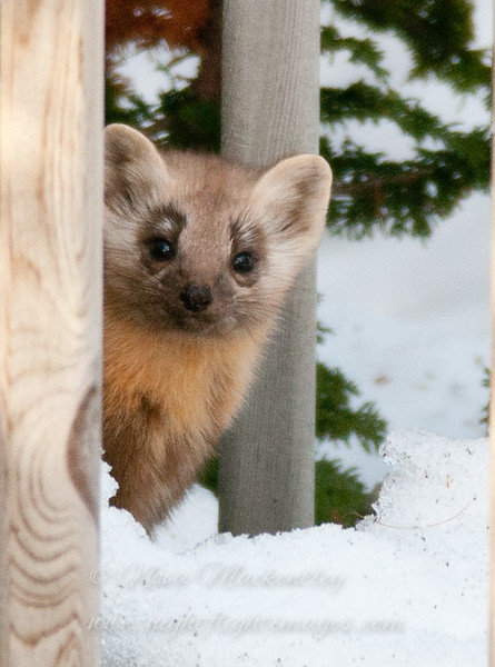 "Pine marten © 2014 Nova Mackentley, Whitefish Point, MI  PMS  <div class=""ss-paypal-button""><div class=""ss-paypal-add-to-cart-section""><div class=""ss-paypal-product-options""><h4>Mat Sizes</h4><ul><li><a href=""https://www.paypal.com/cgi-bin/webscr?cmd=_cart&amp;business=T77V5VKCW4K2U&amp;lc=US&amp;item_name=Pine%20marten%20%C2%A9%202014%20Nova%20Mackentley%2C%20Whitefish%20Point%2C%20MI%20%20PMS&amp;item_number=http%3A%2F%2Fwww.nightflightimages.com%2FGalleries-1%2FMammals%2Fi-mN5PX94&amp;button_subtype=products&amp;no_note=0&amp;cn=Add%20special%20instructions%20to%20the%20seller%3A&amp;no_shipping=2&amp;currency_code=USD&amp;weight_unit=lbs&amp;add=1&amp;bn=PP-ShopCartBF%3Abtn_cart_SM.gif%3ANonHosted&amp;on0=Mat%20Sizes&amp;option_select0=5%20x%207&amp;option_amount0=10.00&amp;option_select1=8%20x%2010&amp;option_amount1=18.00&amp;option_select2=11%20x%2014&amp;option_amount2=28.00&amp;option_select3=card&amp;option_amount3=4.00&amp;option_index=0&amp;charset=utf-8&amp;submit=&amp;os0=5%20x%207"" target=""paypal""><span>5 x 7 $11.00 USD</span><img src=""https://www.paypalobjects.com/en_US/i/btn/btn_cart_SM.gif""></a></li><li><a href=""https://www.paypal.com/cgi-bin/webscr?cmd=_cart&amp;business=T77V5VKCW4K2U&amp;lc=US&amp;item_name=Pine%20marten%20%C2%A9%202014%20Nova%20Mackentley%2C%20Whitefish%20Point%2C%20MI%20%20PMS&amp;item_number=http%3A%2F%2Fwww.nightflightimages.com%2FGalleries-1%2FMammals%2Fi-mN5PX94&amp;button_subtype=products&amp;no_note=0&amp;cn=Add%20special%20instructions%20to%20the%20seller%3A&amp;no_shipping=2&amp;currency_code=USD&amp;weight_unit=lbs&amp;add=1&amp;bn=PP-ShopCartBF%3Abtn_cart_SM.gif%3ANonHosted&amp;on0=Mat%20Sizes&amp;option_select0=5%20x%207&amp;option_amount0=10.00&amp;option_select1=8%20x%2010&amp;option_amount1=18.00&amp;option_select2=11%20x%2014&amp;option_amount2=28.00&amp;option_select3=card&amp;option_amount3=4.00&amp;option_index=0&amp;charset=utf-8&amp;submit=&amp;os0=8%20x%2010"" target=""paypal""><span>8 x 10 $19.00 USD</span><img src=""https://www.paypalobjects.com/en_US/i/btn/btn_cart_SM.gif""></a></li><li><a href=""https://www.paypal.com/cgi-bin/webscr?cmd=_cart&amp;business=T77V5VKCW4K2U&amp;lc=US&amp;item_name=Pine%20marten%20%C2%A9%202014%20Nova%20Mackentley%2C%20Whitefish%20Point%2C%20MI%20%20PMS&amp;item_number=http%3A%2F%2Fwww.nightflightimages.com%2FGalleries-1%2FMammals%2Fi-mN5PX94&amp;button_subtype=products&amp;no_note=0&amp;cn=Add%20special%20instructions%20to%20the%20seller%3A&amp;no_shipping=2&amp;currency_code=USD&amp;weight_unit=lbs&amp;add=1&amp;bn=PP-ShopCartBF%3Abtn_cart_SM.gif%3ANonHosted&amp;on0=Mat%20Sizes&amp;option_select0=5%20x%207&amp;option_amount0=10.00&amp;option_select1=8%20x%2010&amp;option_amount1=18.00&amp;option_select2=11%20x%2014&amp;option_amount2=28.00&amp;option_select3=card&amp;option_amount3=4.00&amp;option_index=0&amp;charset=utf-8&amp;submit=&amp;os0=11%20x%2014"" target=""paypal""><span>11 x 14 $29.00 USD</span><img src=""https://www.paypalobjects.com/en_US/i/btn/btn_cart_SM.gif""></a></li><li><a href=""https://www.paypal.com/cgi-bin/webscr?cmd=_cart&amp;business=T77V5VKCW4K2U&amp;lc=US&amp;item_name=Pine%20marten%20%C2%A9%202014%20Nova%20Mackentley%2C%20Whitefish%20Point%2C%20MI%20%20PMS&amp;item_number=http%3A%2F%2Fwww.nightflightimages.com%2FGalleries-1%2FMammals%2Fi-mN5PX94&amp;button_subtype=products&amp;no_note=0&amp;cn=Add%20special%20instructions%20to%20the%20seller%3A&amp;no_shipping=2&amp;currency_code=USD&amp;weight_unit=lbs&amp;add=1&amp;bn=PP-ShopCartBF%3Abtn_cart_SM.gif%3ANonHosted&amp;on0=Mat%20Sizes&amp;option_select0=5%20x%207&amp;option_amount0=10.00&amp;option_select1=8%20x%2010&amp;option_amount1=18.00&amp;option_select2=11%20x%2014&amp;option_amount2=28.00&amp;option_select3=card&amp;option_amount3=4.00&amp;option_index=0&amp;charset=utf-8&amp;submit=&amp;os0=card"" target=""paypal""><span>card $5.00 USD</span><img src=""https://www.paypalobjects.com/en_US/i/btn/btn_cart_SM.gif""></a></li></ul></div></div> <div class=""ss-paypal-view-cart-section""><a href=""https://www.paypal.com/cgi-bin/webscr?cmd=_cart&amp;business=T77V5VKCW4K2U&amp;display=1&amp;item_name=Pine%20marten%20%C2%A9%202014%20Nova%20Mackentley%2C%20Whitefish%20Point%2C%20MI%20%20PMS&amp;item_number=http%3A%2F%2Fwww.nightflightimages.com%2FGalleries-1%2FMammals%2Fi-mN5PX94&amp;charset=utf-8&amp;submit="" target=""paypal"" class=""ss-paypal-submit-button""><img src=""https://www.paypalobjects.com/en_US/i/btn/btn_viewcart_LG.gif""></a></div></div><div class=""ss-paypal-button-end""></div>"