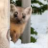 "Pine marten © 2014 Nova Mackentley, Whitefish Point, MI  PMS  <div class=""ss-paypal-button""><div class=""ss-paypal-add-to-cart-section""><div class=""ss-paypal-product-options""><h4>Mat Sizes</h4><ul><li><a href=""https://www.paypal.com/cgi-bin/webscr?cmd=_cart&business=T77V5VKCW4K2U&lc=US&item_name=Pine%20marten%20%C2%A9%202014%20Nova%20Mackentley%2C%20Whitefish%20Point%2C%20MI%20%20PMS&item_number=http%3A%2F%2Fwww.nightflightimages.com%2FGalleries-1%2FMammals%2Fi-mN5PX94&button_subtype=products&no_note=0&cn=Add%20special%20instructions%20to%20the%20seller%3A&no_shipping=2&currency_code=USD&weight_unit=lbs&add=1&bn=PP-ShopCartBF%3Abtn_cart_SM.gif%3ANonHosted&on0=Mat%20Sizes&option_select0=5%20x%207&option_amount0=10.00&option_select1=8%20x%2010&option_amount1=18.00&option_select2=11%20x%2014&option_amount2=28.00&option_select3=card&option_amount3=4.00&option_index=0&charset=utf-8&submit=&os0=5%20x%207"" target=""paypal""><span>5 x 7 $11.00 USD</span><img src=""https://www.paypalobjects.com/en_US/i/btn/btn_cart_SM.gif""></a></li><li><a href=""https://www.paypal.com/cgi-bin/webscr?cmd=_cart&business=T77V5VKCW4K2U&lc=US&item_name=Pine%20marten%20%C2%A9%202014%20Nova%20Mackentley%2C%20Whitefish%20Point%2C%20MI%20%20PMS&item_number=http%3A%2F%2Fwww.nightflightimages.com%2FGalleries-1%2FMammals%2Fi-mN5PX94&button_subtype=products&no_note=0&cn=Add%20special%20instructions%20to%20the%20seller%3A&no_shipping=2&currency_code=USD&weight_unit=lbs&add=1&bn=PP-ShopCartBF%3Abtn_cart_SM.gif%3ANonHosted&on0=Mat%20Sizes&option_select0=5%20x%207&option_amount0=10.00&option_select1=8%20x%2010&option_amount1=18.00&option_select2=11%20x%2014&option_amount2=28.00&option_select3=card&option_amount3=4.00&option_index=0&charset=utf-8&submit=&os0=8%20x%2010"" target=""paypal""><span>8 x 10 $19.00 USD</span><img src=""https://www.paypalobjects.com/en_US/i/btn/btn_cart_SM.gif""></a></li><li><a href=""https://www.paypal.com/cgi-bin/webscr?cmd=_cart&business=T77V5VKCW4K2U&lc=US&item_name=Pine%20marten%20%C2%A9%202014%20Nova%20Mackentley%2C%20Whitefish%20Point%2C%20MI%20%20PMS&item_number=http%3A%2F%2Fwww.nightflightimages.com%2FGalleries-1%2FMammals%2Fi-mN5PX94&button_subtype=products&no_note=0&cn=Add%20special%20instructions%20to%20the%20seller%3A&no_shipping=2&currency_code=USD&weight_unit=lbs&add=1&bn=PP-ShopCartBF%3Abtn_cart_SM.gif%3ANonHosted&on0=Mat%20Sizes&option_select0=5%20x%207&option_amount0=10.00&option_select1=8%20x%2010&option_amount1=18.00&option_select2=11%20x%2014&option_amount2=28.00&option_select3=card&option_amount3=4.00&option_index=0&charset=utf-8&submit=&os0=11%20x%2014"" target=""paypal""><span>11 x 14 $29.00 USD</span><img src=""https://www.paypalobjects.com/en_US/i/btn/btn_cart_SM.gif""></a></li><li><a href=""https://www.paypal.com/cgi-bin/webscr?cmd=_cart&business=T77V5VKCW4K2U&lc=US&item_name=Pine%20marten%20%C2%A9%202014%20Nova%20Mackentley%2C%20Whitefish%20Point%2C%20MI%20%20PMS&item_number=http%3A%2F%2Fwww.nightflightimages.com%2FGalleries-1%2FMammals%2Fi-mN5PX94&button_subtype=products&no_note=0&cn=Add%20special%20instructions%20to%20the%20seller%3A&no_shipping=2&currency_code=USD&weight_unit=lbs&add=1&bn=PP-ShopCartBF%3Abtn_cart_SM.gif%3ANonHosted&on0=Mat%20Sizes&option_select0=5%20x%207&option_amount0=10.00&option_select1=8%20x%2010&option_amount1=18.00&option_select2=11%20x%2014&option_amount2=28.00&option_select3=card&option_amount3=4.00&option_index=0&charset=utf-8&submit=&os0=card"" target=""paypal""><span>card $5.00 USD</span><img src=""https://www.paypalobjects.com/en_US/i/btn/btn_cart_SM.gif""></a></li></ul></div></div> <div class=""ss-paypal-view-cart-section""><a href=""https://www.paypal.com/cgi-bin/webscr?cmd=_cart&business=T77V5VKCW4K2U&display=1&item_name=Pine%20marten%20%C2%A9%202014%20Nova%20Mackentley%2C%20Whitefish%20Point%2C%20MI%20%20PMS&item_number=http%3A%2F%2Fwww.nightflightimages.com%2FGalleries-1%2FMammals%2Fi-mN5PX94&charset=utf-8&submit="" target=""paypal"" class=""ss-paypal-submit-button""><img src=""https://www.paypalobjects.com/en_US/i/btn/btn_viewcart_LG.gif""></a></div></div><div class=""ss-paypal-button-end""></div>"