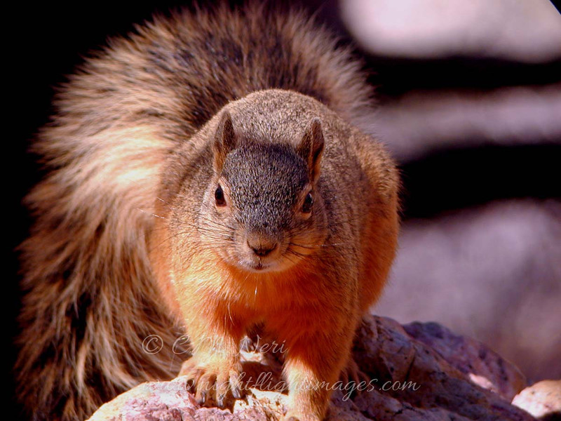 "Apache Fox Squirrel  © 2000 C. M. Neri Chiracahuas mountains, AZ APFS  <div class=""ss-paypal-button""><div class=""ss-paypal-add-to-cart-section""><div class=""ss-paypal-product-options""><h4>Mat Sizes</h4><ul><li><a href=""https://www.paypal.com/cgi-bin/webscr?cmd=_cart&amp;business=T77V5VKCW4K2U&amp;lc=US&amp;item_name=Apache%20Fox%20Squirrel%20%20%C2%A9%202000%20C.%20M.%20Neri%20Chiracahuas%20mountains%2C%20AZ%20APFS&amp;item_number=http%3A%2F%2Fwww.nightflightimages.com%2FGalleries-1%2FMammals%2Fi-nmCZ5nS&amp;button_subtype=products&amp;no_note=0&amp;cn=Add%20special%20instructions%20to%20the%20seller%3A&amp;no_shipping=2&amp;currency_code=USD&amp;weight_unit=lbs&amp;add=1&amp;bn=PP-ShopCartBF%3Abtn_cart_SM.gif%3ANonHosted&amp;on0=Mat%20Sizes&amp;option_select0=5%20x%207&amp;option_amount0=10.00&amp;option_select1=8%20x%2010&amp;option_amount1=18.00&amp;option_select2=11%20x%2014&amp;option_amount2=28.00&amp;option_select3=card&amp;option_amount3=4.00&amp;option_index=0&amp;charset=utf-8&amp;submit=&amp;os0=5%20x%207"" target=""paypal""><span>5 x 7 $11.00 USD</span><img src=""https://www.paypalobjects.com/en_US/i/btn/btn_cart_SM.gif""></a></li><li><a href=""https://www.paypal.com/cgi-bin/webscr?cmd=_cart&amp;business=T77V5VKCW4K2U&amp;lc=US&amp;item_name=Apache%20Fox%20Squirrel%20%20%C2%A9%202000%20C.%20M.%20Neri%20Chiracahuas%20mountains%2C%20AZ%20APFS&amp;item_number=http%3A%2F%2Fwww.nightflightimages.com%2FGalleries-1%2FMammals%2Fi-nmCZ5nS&amp;button_subtype=products&amp;no_note=0&amp;cn=Add%20special%20instructions%20to%20the%20seller%3A&amp;no_shipping=2&amp;currency_code=USD&amp;weight_unit=lbs&amp;add=1&amp;bn=PP-ShopCartBF%3Abtn_cart_SM.gif%3ANonHosted&amp;on0=Mat%20Sizes&amp;option_select0=5%20x%207&amp;option_amount0=10.00&amp;option_select1=8%20x%2010&amp;option_amount1=18.00&amp;option_select2=11%20x%2014&amp;option_amount2=28.00&amp;option_select3=card&amp;option_amount3=4.00&amp;option_index=0&amp;charset=utf-8&amp;submit=&amp;os0=8%20x%2010"" target=""paypal""><span>8 x 10 $19.00 USD</span><img src=""https://www.paypalobjects.com/en_US/i/btn/btn_cart_SM.gif""></a></li><li><a href=""https://www.paypal.com/cgi-bin/webscr?cmd=_cart&amp;business=T77V5VKCW4K2U&amp;lc=US&amp;item_name=Apache%20Fox%20Squirrel%20%20%C2%A9%202000%20C.%20M.%20Neri%20Chiracahuas%20mountains%2C%20AZ%20APFS&amp;item_number=http%3A%2F%2Fwww.nightflightimages.com%2FGalleries-1%2FMammals%2Fi-nmCZ5nS&amp;button_subtype=products&amp;no_note=0&amp;cn=Add%20special%20instructions%20to%20the%20seller%3A&amp;no_shipping=2&amp;currency_code=USD&amp;weight_unit=lbs&amp;add=1&amp;bn=PP-ShopCartBF%3Abtn_cart_SM.gif%3ANonHosted&amp;on0=Mat%20Sizes&amp;option_select0=5%20x%207&amp;option_amount0=10.00&amp;option_select1=8%20x%2010&amp;option_amount1=18.00&amp;option_select2=11%20x%2014&amp;option_amount2=28.00&amp;option_select3=card&amp;option_amount3=4.00&amp;option_index=0&amp;charset=utf-8&amp;submit=&amp;os0=11%20x%2014"" target=""paypal""><span>11 x 14 $29.00 USD</span><img src=""https://www.paypalobjects.com/en_US/i/btn/btn_cart_SM.gif""></a></li><li><a href=""https://www.paypal.com/cgi-bin/webscr?cmd=_cart&amp;business=T77V5VKCW4K2U&amp;lc=US&amp;item_name=Apache%20Fox%20Squirrel%20%20%C2%A9%202000%20C.%20M.%20Neri%20Chiracahuas%20mountains%2C%20AZ%20APFS&amp;item_number=http%3A%2F%2Fwww.nightflightimages.com%2FGalleries-1%2FMammals%2Fi-nmCZ5nS&amp;button_subtype=products&amp;no_note=0&amp;cn=Add%20special%20instructions%20to%20the%20seller%3A&amp;no_shipping=2&amp;currency_code=USD&amp;weight_unit=lbs&amp;add=1&amp;bn=PP-ShopCartBF%3Abtn_cart_SM.gif%3ANonHosted&amp;on0=Mat%20Sizes&amp;option_select0=5%20x%207&amp;option_amount0=10.00&amp;option_select1=8%20x%2010&amp;option_amount1=18.00&amp;option_select2=11%20x%2014&amp;option_amount2=28.00&amp;option_select3=card&amp;option_amount3=4.00&amp;option_index=0&amp;charset=utf-8&amp;submit=&amp;os0=card"" target=""paypal""><span>card $5.00 USD</span><img src=""https://www.paypalobjects.com/en_US/i/btn/btn_cart_SM.gif""></a></li></ul></div></div> <div class=""ss-paypal-view-cart-section""><a href=""https://www.paypal.com/cgi-bin/webscr?cmd=_cart&amp;business=T77V5VKCW4K2U&amp;display=1&amp;item_name=Apache%20Fox%20Squirrel%20%20%C2%A9%202000%20C.%20M.%20Neri%20Chiracahuas%20mountains%2C%20AZ%20APFS&amp;item_number=http%3A%2F%2Fwww.nightflightimages.com%2FGalleries-1%2FMammals%2Fi-nmCZ5nS&amp;charset=utf-8&amp;submit="" target=""paypal"" class=""ss-paypal-submit-button""><img src=""https://www.paypalobjects.com/en_US/i/btn/btn_viewcart_LG.gif""></a></div></div><div class=""ss-paypal-button-end""></div>"