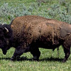 "Bison © 2002 C. M. Neri.  Yellowstone National Park, WY BISON  <div class=""ss-paypal-button""><div class=""ss-paypal-add-to-cart-section""><div class=""ss-paypal-product-options""><h4>Mat Sizes</h4><ul><li><a href=""https://www.paypal.com/cgi-bin/webscr?cmd=_cart&business=T77V5VKCW4K2U&lc=US&item_name=Bison%20%C2%A9%202002%20C.%20M.%20Neri.%20%20Yellowstone%20National%20Park%2C%20WY%20BISON&item_number=http%3A%2F%2Fwww.nightflightimages.com%2FGalleries-1%2FTravels%2Fi-nvZqnFm&button_subtype=products&no_note=0&cn=Add%20special%20instructions%20to%20the%20seller%3A&no_shipping=2&currency_code=USD&weight_unit=lbs&add=1&bn=PP-ShopCartBF%3Abtn_cart_SM.gif%3ANonHosted&on0=Mat%20Sizes&option_select0=5%20x%207&option_amount0=10.00&option_select1=8%20x%2010&option_amount1=18.00&option_select2=11%20x%2014&option_amount2=28.00&option_select3=card&option_amount3=4.00&option_index=0&charset=utf-8&submit=&os0=5%20x%207"" target=""paypal""><span>5 x 7 $11.00 USD</span><img src=""https://www.paypalobjects.com/en_US/i/btn/btn_cart_SM.gif""></a></li><li><a href=""https://www.paypal.com/cgi-bin/webscr?cmd=_cart&business=T77V5VKCW4K2U&lc=US&item_name=Bison%20%C2%A9%202002%20C.%20M.%20Neri.%20%20Yellowstone%20National%20Park%2C%20WY%20BISON&item_number=http%3A%2F%2Fwww.nightflightimages.com%2FGalleries-1%2FTravels%2Fi-nvZqnFm&button_subtype=products&no_note=0&cn=Add%20special%20instructions%20to%20the%20seller%3A&no_shipping=2&currency_code=USD&weight_unit=lbs&add=1&bn=PP-ShopCartBF%3Abtn_cart_SM.gif%3ANonHosted&on0=Mat%20Sizes&option_select0=5%20x%207&option_amount0=10.00&option_select1=8%20x%2010&option_amount1=18.00&option_select2=11%20x%2014&option_amount2=28.00&option_select3=card&option_amount3=4.00&option_index=0&charset=utf-8&submit=&os0=8%20x%2010"" target=""paypal""><span>8 x 10 $19.00 USD</span><img src=""https://www.paypalobjects.com/en_US/i/btn/btn_cart_SM.gif""></a></li><li><a href=""https://www.paypal.com/cgi-bin/webscr?cmd=_cart&business=T77V5VKCW4K2U&lc=US&item_name=Bison%20%C2%A9%202002%20C.%20M.%20Neri.%20%20Yellowstone%20National%20Park%2C%20WY%20BISON&item_number=http%3A%2F%2Fwww.nightflightimages.com%2FGalleries-1%2FTravels%2Fi-nvZqnFm&button_subtype=products&no_note=0&cn=Add%20special%20instructions%20to%20the%20seller%3A&no_shipping=2&currency_code=USD&weight_unit=lbs&add=1&bn=PP-ShopCartBF%3Abtn_cart_SM.gif%3ANonHosted&on0=Mat%20Sizes&option_select0=5%20x%207&option_amount0=10.00&option_select1=8%20x%2010&option_amount1=18.00&option_select2=11%20x%2014&option_amount2=28.00&option_select3=card&option_amount3=4.00&option_index=0&charset=utf-8&submit=&os0=11%20x%2014"" target=""paypal""><span>11 x 14 $29.00 USD</span><img src=""https://www.paypalobjects.com/en_US/i/btn/btn_cart_SM.gif""></a></li><li><a href=""https://www.paypal.com/cgi-bin/webscr?cmd=_cart&business=T77V5VKCW4K2U&lc=US&item_name=Bison%20%C2%A9%202002%20C.%20M.%20Neri.%20%20Yellowstone%20National%20Park%2C%20WY%20BISON&item_number=http%3A%2F%2Fwww.nightflightimages.com%2FGalleries-1%2FTravels%2Fi-nvZqnFm&button_subtype=products&no_note=0&cn=Add%20special%20instructions%20to%20the%20seller%3A&no_shipping=2&currency_code=USD&weight_unit=lbs&add=1&bn=PP-ShopCartBF%3Abtn_cart_SM.gif%3ANonHosted&on0=Mat%20Sizes&option_select0=5%20x%207&option_amount0=10.00&option_select1=8%20x%2010&option_amount1=18.00&option_select2=11%20x%2014&option_amount2=28.00&option_select3=card&option_amount3=4.00&option_index=0&charset=utf-8&submit=&os0=card"" target=""paypal""><span>card $5.00 USD</span><img src=""https://www.paypalobjects.com/en_US/i/btn/btn_cart_SM.gif""></a></li></ul></div></div> <div class=""ss-paypal-view-cart-section""><a href=""https://www.paypal.com/cgi-bin/webscr?cmd=_cart&business=T77V5VKCW4K2U&display=1&item_name=Bison%20%C2%A9%202002%20C.%20M.%20Neri.%20%20Yellowstone%20National%20Park%2C%20WY%20BISON&item_number=http%3A%2F%2Fwww.nightflightimages.com%2FGalleries-1%2FTravels%2Fi-nvZqnFm&charset=utf-8&submit="" target=""paypal"" class=""ss-paypal-submit-button""><img src=""https://www.paypalobjects.com/en_US/i/btn/btn_viewcart_LG.gif""></a></div></div><div class=""ss-paypal-button-end""></div>"