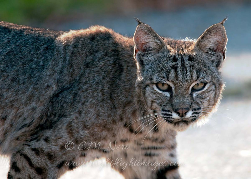 """Bobcat  © 2010 C. M. Neri Montana De Oro, CA BOBC!  <div class=""""ss-paypal-button""""><div class=""""ss-paypal-add-to-cart-section""""><div class=""""ss-paypal-product-options""""><h4>Mat Sizes</h4><ul><li><a href=""""https://www.paypal.com/cgi-bin/webscr?cmd=_cart&business=T77V5VKCW4K2U&lc=US&item_name=Bobcat%20%20%C2%A9%202010%20C.%20M.%20Neri%20Montana%20De%20Oro%2C%20CA%20BOBC!&item_number=http%3A%2F%2Fwww.nightflightimages.com%2FGalleries-1%2FMammals%2Fi-p7gvmSd&button_subtype=products&no_note=0&cn=Add%20special%20instructions%20to%20the%20seller%3A&no_shipping=2&currency_code=USD&weight_unit=lbs&add=1&bn=PP-ShopCartBF%3Abtn_cart_SM.gif%3ANonHosted&on0=Mat%20Sizes&option_select0=5%20x%207&option_amount0=10.00&option_select1=8%20x%2010&option_amount1=18.00&option_select2=11%20x%2014&option_amount2=28.00&option_select3=card&option_amount3=4.00&option_index=0&charset=utf-8&submit=&os0=5%20x%207"""" target=""""paypal""""><span>5 x 7 $11.00 USD</span><img src=""""https://www.paypalobjects.com/en_US/i/btn/btn_cart_SM.gif""""></a></li><li><a href=""""https://www.paypal.com/cgi-bin/webscr?cmd=_cart&business=T77V5VKCW4K2U&lc=US&item_name=Bobcat%20%20%C2%A9%202010%20C.%20M.%20Neri%20Montana%20De%20Oro%2C%20CA%20BOBC!&item_number=http%3A%2F%2Fwww.nightflightimages.com%2FGalleries-1%2FMammals%2Fi-p7gvmSd&button_subtype=products&no_note=0&cn=Add%20special%20instructions%20to%20the%20seller%3A&no_shipping=2&currency_code=USD&weight_unit=lbs&add=1&bn=PP-ShopCartBF%3Abtn_cart_SM.gif%3ANonHosted&on0=Mat%20Sizes&option_select0=5%20x%207&option_amount0=10.00&option_select1=8%20x%2010&option_amount1=18.00&option_select2=11%20x%2014&option_amount2=28.00&option_select3=card&option_amount3=4.00&option_index=0&charset=utf-8&submit=&os0=8%20x%2010"""" target=""""paypal""""><span>8 x 10 $19.00 USD</span><img src=""""https://www.paypalobjects.com/en_US/i/btn/btn_cart_SM.gif""""></a></li><li><a href=""""https://www.paypal.com/cgi-bin/webscr?cmd=_cart&business=T77V5VKCW4K2U&lc=US&item_name=Bobcat%20%20%C2%A9%202010%20C.%20M.%20Neri%20Montana%2"""