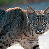 "Bobcat  © 2010 C. M. Neri Montana De Oro, CA BOBC!  <div class=""ss-paypal-button""><div class=""ss-paypal-add-to-cart-section""><div class=""ss-paypal-product-options""><h4>Mat Sizes</h4><ul><li><a href=""https://www.paypal.com/cgi-bin/webscr?cmd=_cart&business=T77V5VKCW4K2U&lc=US&item_name=Bobcat%20%20%C2%A9%202010%20C.%20M.%20Neri%20Montana%20De%20Oro%2C%20CA%20BOBC!&item_number=http%3A%2F%2Fwww.nightflightimages.com%2FGalleries-1%2FMammals%2Fi-p7gvmSd&button_subtype=products&no_note=0&cn=Add%20special%20instructions%20to%20the%20seller%3A&no_shipping=2&currency_code=USD&weight_unit=lbs&add=1&bn=PP-ShopCartBF%3Abtn_cart_SM.gif%3ANonHosted&on0=Mat%20Sizes&option_select0=5%20x%207&option_amount0=10.00&option_select1=8%20x%2010&option_amount1=18.00&option_select2=11%20x%2014&option_amount2=28.00&option_select3=card&option_amount3=4.00&option_index=0&charset=utf-8&submit=&os0=5%20x%207"" target=""paypal""><span>5 x 7 $11.00 USD</span><img src=""https://www.paypalobjects.com/en_US/i/btn/btn_cart_SM.gif""></a></li><li><a href=""https://www.paypal.com/cgi-bin/webscr?cmd=_cart&business=T77V5VKCW4K2U&lc=US&item_name=Bobcat%20%20%C2%A9%202010%20C.%20M.%20Neri%20Montana%20De%20Oro%2C%20CA%20BOBC!&item_number=http%3A%2F%2Fwww.nightflightimages.com%2FGalleries-1%2FMammals%2Fi-p7gvmSd&button_subtype=products&no_note=0&cn=Add%20special%20instructions%20to%20the%20seller%3A&no_shipping=2&currency_code=USD&weight_unit=lbs&add=1&bn=PP-ShopCartBF%3Abtn_cart_SM.gif%3ANonHosted&on0=Mat%20Sizes&option_select0=5%20x%207&option_amount0=10.00&option_select1=8%20x%2010&option_amount1=18.00&option_select2=11%20x%2014&option_amount2=28.00&option_select3=card&option_amount3=4.00&option_index=0&charset=utf-8&submit=&os0=8%20x%2010"" target=""paypal""><span>8 x 10 $19.00 USD</span><img src=""https://www.paypalobjects.com/en_US/i/btn/btn_cart_SM.gif""></a></li><li><a href=""https://www.paypal.com/cgi-bin/webscr?cmd=_cart&business=T77V5VKCW4K2U&lc=US&item_name=Bobcat%20%20%C2%A9%202010%20C.%20M.%20Neri%20Montana%20De%20Oro%2C%20CA%20BOBC!&item_number=http%3A%2F%2Fwww.nightflightimages.com%2FGalleries-1%2FMammals%2Fi-p7gvmSd&button_subtype=products&no_note=0&cn=Add%20special%20instructions%20to%20the%20seller%3A&no_shipping=2&currency_code=USD&weight_unit=lbs&add=1&bn=PP-ShopCartBF%3Abtn_cart_SM.gif%3ANonHosted&on0=Mat%20Sizes&option_select0=5%20x%207&option_amount0=10.00&option_select1=8%20x%2010&option_amount1=18.00&option_select2=11%20x%2014&option_amount2=28.00&option_select3=card&option_amount3=4.00&option_index=0&charset=utf-8&submit=&os0=11%20x%2014"" target=""paypal""><span>11 x 14 $29.00 USD</span><img src=""https://www.paypalobjects.com/en_US/i/btn/btn_cart_SM.gif""></a></li><li><a href=""https://www.paypal.com/cgi-bin/webscr?cmd=_cart&business=T77V5VKCW4K2U&lc=US&item_name=Bobcat%20%20%C2%A9%202010%20C.%20M.%20Neri%20Montana%20De%20Oro%2C%20CA%20BOBC!&item_number=http%3A%2F%2Fwww.nightflightimages.com%2FGalleries-1%2FMammals%2Fi-p7gvmSd&button_subtype=products&no_note=0&cn=Add%20special%20instructions%20to%20the%20seller%3A&no_shipping=2&currency_code=USD&weight_unit=lbs&add=1&bn=PP-ShopCartBF%3Abtn_cart_SM.gif%3ANonHosted&on0=Mat%20Sizes&option_select0=5%20x%207&option_amount0=10.00&option_select1=8%20x%2010&option_amount1=18.00&option_select2=11%20x%2014&option_amount2=28.00&option_select3=card&option_amount3=4.00&option_index=0&charset=utf-8&submit=&os0=card"" target=""paypal""><span>card $5.00 USD</span><img src=""https://www.paypalobjects.com/en_US/i/btn/btn_cart_SM.gif""></a></li></ul></div></div> <div class=""ss-paypal-view-cart-section""><a href=""https://www.paypal.com/cgi-bin/webscr?cmd=_cart&business=T77V5VKCW4K2U&display=1&item_name=Bobcat%20%20%C2%A9%202010%20C.%20M.%20Neri%20Montana%20De%20Oro%2C%20CA%20BOBC!&item_number=http%3A%2F%2Fwww.nightflightimages.com%2FGalleries-1%2FMammals%2Fi-p7gvmSd&charset=utf-8&submit="" target=""paypal"" class=""ss-paypal-submit-button""><img src=""https://www.paypalobjects.com/en_US/i/btn/btn_viewcart_LG.gif""></a></div></div><div class=""ss-paypal-button-end""></div>"