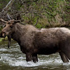 "Moose © 2009 C. M. Neri Rocky Mountain National Park, CO MOOSECO  <div class=""ss-paypal-button""><div class=""ss-paypal-add-to-cart-section""><div class=""ss-paypal-product-options""><h4>Mat Sizes</h4><ul><li><a href=""https://www.paypal.com/cgi-bin/webscr?cmd=_cart&business=T77V5VKCW4K2U&lc=US&item_name=Moose%20%C2%A9%202009%20C.%20M.%20Neri%20Rocky%20Mountain%20National%20Park%2C%20CO%20MOOSECO&item_number=http%3A%2F%2Fwww.nightflightimages.com%2FGalleries-1%2FTravels%2Fi-rHRhLkQ&button_subtype=products&no_note=0&cn=Add%20special%20instructions%20to%20the%20seller%3A&no_shipping=2&currency_code=USD&weight_unit=lbs&add=1&bn=PP-ShopCartBF%3Abtn_cart_SM.gif%3ANonHosted&on0=Mat%20Sizes&option_select0=5%20x%207&option_amount0=10.00&option_select1=8%20x%2010&option_amount1=18.00&option_select2=11%20x%2014&option_amount2=28.00&option_select3=card&option_amount3=4.00&option_index=0&charset=utf-8&submit=&os0=5%20x%207"" target=""paypal""><span>5 x 7 $11.00 USD</span><img src=""https://www.paypalobjects.com/en_US/i/btn/btn_cart_SM.gif""></a></li><li><a href=""https://www.paypal.com/cgi-bin/webscr?cmd=_cart&business=T77V5VKCW4K2U&lc=US&item_name=Moose%20%C2%A9%202009%20C.%20M.%20Neri%20Rocky%20Mountain%20National%20Park%2C%20CO%20MOOSECO&item_number=http%3A%2F%2Fwww.nightflightimages.com%2FGalleries-1%2FTravels%2Fi-rHRhLkQ&button_subtype=products&no_note=0&cn=Add%20special%20instructions%20to%20the%20seller%3A&no_shipping=2&currency_code=USD&weight_unit=lbs&add=1&bn=PP-ShopCartBF%3Abtn_cart_SM.gif%3ANonHosted&on0=Mat%20Sizes&option_select0=5%20x%207&option_amount0=10.00&option_select1=8%20x%2010&option_amount1=18.00&option_select2=11%20x%2014&option_amount2=28.00&option_select3=card&option_amount3=4.00&option_index=0&charset=utf-8&submit=&os0=8%20x%2010"" target=""paypal""><span>8 x 10 $19.00 USD</span><img src=""https://www.paypalobjects.com/en_US/i/btn/btn_cart_SM.gif""></a></li><li><a href=""https://www.paypal.com/cgi-bin/webscr?cmd=_cart&business=T77V5VKCW4K2U&lc=US&item_name=Moose%20%C2%A9%202009%20C.%20M.%20Neri%20Rocky%20Mountain%20National%20Park%2C%20CO%20MOOSECO&item_number=http%3A%2F%2Fwww.nightflightimages.com%2FGalleries-1%2FTravels%2Fi-rHRhLkQ&button_subtype=products&no_note=0&cn=Add%20special%20instructions%20to%20the%20seller%3A&no_shipping=2&currency_code=USD&weight_unit=lbs&add=1&bn=PP-ShopCartBF%3Abtn_cart_SM.gif%3ANonHosted&on0=Mat%20Sizes&option_select0=5%20x%207&option_amount0=10.00&option_select1=8%20x%2010&option_amount1=18.00&option_select2=11%20x%2014&option_amount2=28.00&option_select3=card&option_amount3=4.00&option_index=0&charset=utf-8&submit=&os0=11%20x%2014"" target=""paypal""><span>11 x 14 $29.00 USD</span><img src=""https://www.paypalobjects.com/en_US/i/btn/btn_cart_SM.gif""></a></li><li><a href=""https://www.paypal.com/cgi-bin/webscr?cmd=_cart&business=T77V5VKCW4K2U&lc=US&item_name=Moose%20%C2%A9%202009%20C.%20M.%20Neri%20Rocky%20Mountain%20National%20Park%2C%20CO%20MOOSECO&item_number=http%3A%2F%2Fwww.nightflightimages.com%2FGalleries-1%2FTravels%2Fi-rHRhLkQ&button_subtype=products&no_note=0&cn=Add%20special%20instructions%20to%20the%20seller%3A&no_shipping=2&currency_code=USD&weight_unit=lbs&add=1&bn=PP-ShopCartBF%3Abtn_cart_SM.gif%3ANonHosted&on0=Mat%20Sizes&option_select0=5%20x%207&option_amount0=10.00&option_select1=8%20x%2010&option_amount1=18.00&option_select2=11%20x%2014&option_amount2=28.00&option_select3=card&option_amount3=4.00&option_index=0&charset=utf-8&submit=&os0=card"" target=""paypal""><span>card $5.00 USD</span><img src=""https://www.paypalobjects.com/en_US/i/btn/btn_cart_SM.gif""></a></li></ul></div></div> <div class=""ss-paypal-view-cart-section""><a href=""https://www.paypal.com/cgi-bin/webscr?cmd=_cart&business=T77V5VKCW4K2U&display=1&item_name=Moose%20%C2%A9%202009%20C.%20M.%20Neri%20Rocky%20Mountain%20National%20Park%2C%20CO%20MOOSECO&item_number=http%3A%2F%2Fwww.nightflightimages.com%2FGalleries-1%2FTravels%2Fi-rHRhLkQ&charset=utf-8&submit="" target=""paypal"" class=""ss-paypal-submit-button""><img src=""https://www.paypalobjects.com/en_US/i/btn/btn_viewcart_LG.gif""></a></div></div><div class=""ss-paypal-button-end""></div>"