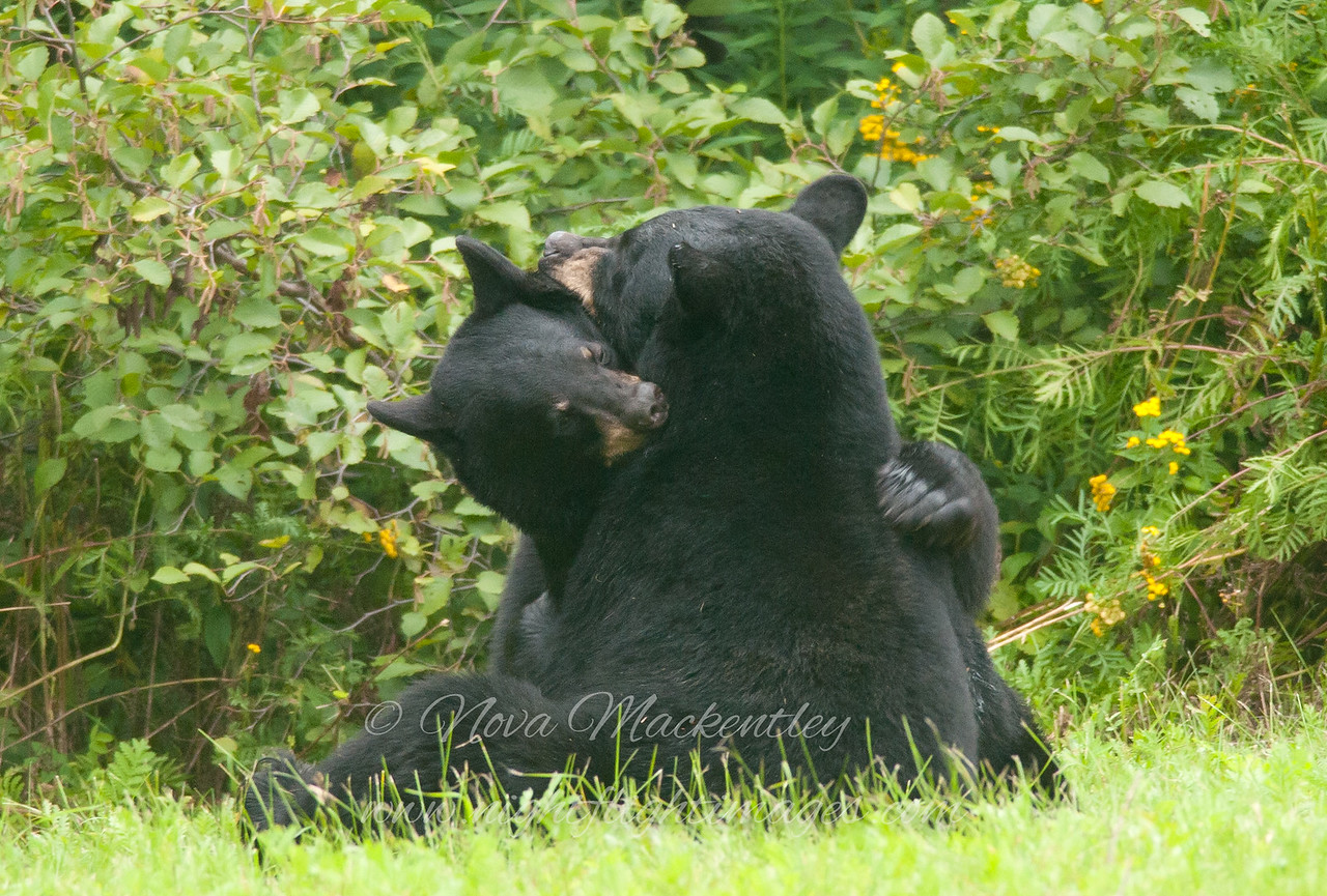 "Bear hug © 2014 Nova Mackentley Duluth, MN  BHU  <div class=""ss-paypal-button""><div class=""ss-paypal-add-to-cart-section""><div class=""ss-paypal-product-options""><h4>Mat Sizes</h4><ul><li><a href=""https://www.paypal.com/cgi-bin/webscr?cmd=_cart&business=T77V5VKCW4K2U&lc=US&item_name=Bear%20hug%20%C2%A9%202014%20Nova%20Mackentley%20Duluth%2C%20MN%20%20BHU&item_number=http%3A%2F%2Fwww.nightflightimages.com%2FGalleries-1%2FMammals%2Fi-ttZvw99&button_subtype=products&no_note=0&cn=Add%20special%20instructions%20to%20the%20seller%3A&no_shipping=2&currency_code=USD&weight_unit=lbs&add=1&bn=PP-ShopCartBF%3Abtn_cart_SM.gif%3ANonHosted&on0=Mat%20Sizes&option_select0=5%20x%207&option_amount0=10.00&option_select1=8%20x%2010&option_amount1=18.00&option_select2=11%20x%2014&option_amount2=28.00&option_select3=card&option_amount3=4.00&option_index=0&charset=utf-8&submit=&os0=5%20x%207"" target=""paypal""><span>5 x 7 $11.00 USD</span><img src=""https://www.paypalobjects.com/en_US/i/btn/btn_cart_SM.gif""></a></li><li><a href=""https://www.paypal.com/cgi-bin/webscr?cmd=_cart&business=T77V5VKCW4K2U&lc=US&item_name=Bear%20hug%20%C2%A9%202014%20Nova%20Mackentley%20Duluth%2C%20MN%20%20BHU&item_number=http%3A%2F%2Fwww.nightflightimages.com%2FGalleries-1%2FMammals%2Fi-ttZvw99&button_subtype=products&no_note=0&cn=Add%20special%20instructions%20to%20the%20seller%3A&no_shipping=2&currency_code=USD&weight_unit=lbs&add=1&bn=PP-ShopCartBF%3Abtn_cart_SM.gif%3ANonHosted&on0=Mat%20Sizes&option_select0=5%20x%207&option_amount0=10.00&option_select1=8%20x%2010&option_amount1=18.00&option_select2=11%20x%2014&option_amount2=28.00&option_select3=card&option_amount3=4.00&option_index=0&charset=utf-8&submit=&os0=8%20x%2010"" target=""paypal""><span>8 x 10 $19.00 USD</span><img src=""https://www.paypalobjects.com/en_US/i/btn/btn_cart_SM.gif""></a></li><li><a href=""https://www.paypal.com/cgi-bin/webscr?cmd=_cart&business=T77V5VKCW4K2U&lc=US&item_name=Bear%20hug%20%C2%A9%202014%20Nova%20Mackentley%20Duluth%2C%20MN%20%20BHU&item_number=http%3A%2F%2Fwww.nightflightimages.com%2FGalleries-1%2FMammals%2Fi-ttZvw99&button_subtype=products&no_note=0&cn=Add%20special%20instructions%20to%20the%20seller%3A&no_shipping=2&currency_code=USD&weight_unit=lbs&add=1&bn=PP-ShopCartBF%3Abtn_cart_SM.gif%3ANonHosted&on0=Mat%20Sizes&option_select0=5%20x%207&option_amount0=10.00&option_select1=8%20x%2010&option_amount1=18.00&option_select2=11%20x%2014&option_amount2=28.00&option_select3=card&option_amount3=4.00&option_index=0&charset=utf-8&submit=&os0=11%20x%2014"" target=""paypal""><span>11 x 14 $29.00 USD</span><img src=""https://www.paypalobjects.com/en_US/i/btn/btn_cart_SM.gif""></a></li><li><a href=""https://www.paypal.com/cgi-bin/webscr?cmd=_cart&business=T77V5VKCW4K2U&lc=US&item_name=Bear%20hug%20%C2%A9%202014%20Nova%20Mackentley%20Duluth%2C%20MN%20%20BHU&item_number=http%3A%2F%2Fwww.nightflightimages.com%2FGalleries-1%2FMammals%2Fi-ttZvw99&button_subtype=products&no_note=0&cn=Add%20special%20instructions%20to%20the%20seller%3A&no_shipping=2&currency_code=USD&weight_unit=lbs&add=1&bn=PP-ShopCartBF%3Abtn_cart_SM.gif%3ANonHosted&on0=Mat%20Sizes&option_select0=5%20x%207&option_amount0=10.00&option_select1=8%20x%2010&option_amount1=18.00&option_select2=11%20x%2014&option_amount2=28.00&option_select3=card&option_amount3=4.00&option_index=0&charset=utf-8&submit=&os0=card"" target=""paypal""><span>card $5.00 USD</span><img src=""https://www.paypalobjects.com/en_US/i/btn/btn_cart_SM.gif""></a></li></ul></div></div> <div class=""ss-paypal-view-cart-section""><a href=""https://www.paypal.com/cgi-bin/webscr?cmd=_cart&business=T77V5VKCW4K2U&display=1&item_name=Bear%20hug%20%C2%A9%202014%20Nova%20Mackentley%20Duluth%2C%20MN%20%20BHU&item_number=http%3A%2F%2Fwww.nightflightimages.com%2FGalleries-1%2FMammals%2Fi-ttZvw99&charset=utf-8&submit="" target=""paypal"" class=""ss-paypal-submit-button""><img src=""https://www.paypalobjects.com/en_US/i/btn/btn_viewcart_LG.gif""></a></div></div><div class=""ss-paypal-button-end""></div>"