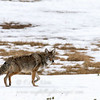 "Coyote © 2010 C. M. Neri.  Yosemite National Park, CA COYOY  <div class=""ss-paypal-button""><div class=""ss-paypal-add-to-cart-section""><div class=""ss-paypal-product-options""><h4>Mat Sizes</h4><ul><li><a href=""https://www.paypal.com/cgi-bin/webscr?cmd=_cart&amp;business=T77V5VKCW4K2U&amp;lc=US&amp;item_name=Coyote%20%C2%A9%202010%20C.%20M.%20Neri.%20%20Yosemite%20National%20Park%2C%20CA%20COYOY&amp;item_number=http%3A%2F%2Fwww.nightflightimages.com%2FGalleries-1%2FTravels%2Fi-vC8bh93&amp;button_subtype=products&amp;no_note=0&amp;cn=Add%20special%20instructions%20to%20the%20seller%3A&amp;no_shipping=2&amp;currency_code=USD&amp;weight_unit=lbs&amp;add=1&amp;bn=PP-ShopCartBF%3Abtn_cart_SM.gif%3ANonHosted&amp;on0=Mat%20Sizes&amp;option_select0=5%20x%207&amp;option_amount0=10.00&amp;option_select1=8%20x%2010&amp;option_amount1=18.00&amp;option_select2=11%20x%2014&amp;option_amount2=28.00&amp;option_select3=card&amp;option_amount3=4.00&amp;option_index=0&amp;charset=utf-8&amp;submit=&amp;os0=5%20x%207"" target=""paypal""><span>5 x 7 $11.00 USD</span><img src=""https://www.paypalobjects.com/en_US/i/btn/btn_cart_SM.gif""></a></li><li><a href=""https://www.paypal.com/cgi-bin/webscr?cmd=_cart&amp;business=T77V5VKCW4K2U&amp;lc=US&amp;item_name=Coyote%20%C2%A9%202010%20C.%20M.%20Neri.%20%20Yosemite%20National%20Park%2C%20CA%20COYOY&amp;item_number=http%3A%2F%2Fwww.nightflightimages.com%2FGalleries-1%2FTravels%2Fi-vC8bh93&amp;button_subtype=products&amp;no_note=0&amp;cn=Add%20special%20instructions%20to%20the%20seller%3A&amp;no_shipping=2&amp;currency_code=USD&amp;weight_unit=lbs&amp;add=1&amp;bn=PP-ShopCartBF%3Abtn_cart_SM.gif%3ANonHosted&amp;on0=Mat%20Sizes&amp;option_select0=5%20x%207&amp;option_amount0=10.00&amp;option_select1=8%20x%2010&amp;option_amount1=18.00&amp;option_select2=11%20x%2014&amp;option_amount2=28.00&amp;option_select3=card&amp;option_amount3=4.00&amp;option_index=0&amp;charset=utf-8&amp;submit=&amp;os0=8%20x%2010"" target=""paypal""><span>8 x 10 $19.00 USD</span><img src=""https://www.paypalobjects.com/en_US/i/btn/btn_cart_SM.gif""></a></li><li><a href=""https://www.paypal.com/cgi-bin/webscr?cmd=_cart&amp;business=T77V5VKCW4K2U&amp;lc=US&amp;item_name=Coyote%20%C2%A9%202010%20C.%20M.%20Neri.%20%20Yosemite%20National%20Park%2C%20CA%20COYOY&amp;item_number=http%3A%2F%2Fwww.nightflightimages.com%2FGalleries-1%2FTravels%2Fi-vC8bh93&amp;button_subtype=products&amp;no_note=0&amp;cn=Add%20special%20instructions%20to%20the%20seller%3A&amp;no_shipping=2&amp;currency_code=USD&amp;weight_unit=lbs&amp;add=1&amp;bn=PP-ShopCartBF%3Abtn_cart_SM.gif%3ANonHosted&amp;on0=Mat%20Sizes&amp;option_select0=5%20x%207&amp;option_amount0=10.00&amp;option_select1=8%20x%2010&amp;option_amount1=18.00&amp;option_select2=11%20x%2014&amp;option_amount2=28.00&amp;option_select3=card&amp;option_amount3=4.00&amp;option_index=0&amp;charset=utf-8&amp;submit=&amp;os0=11%20x%2014"" target=""paypal""><span>11 x 14 $29.00 USD</span><img src=""https://www.paypalobjects.com/en_US/i/btn/btn_cart_SM.gif""></a></li><li><a href=""https://www.paypal.com/cgi-bin/webscr?cmd=_cart&amp;business=T77V5VKCW4K2U&amp;lc=US&amp;item_name=Coyote%20%C2%A9%202010%20C.%20M.%20Neri.%20%20Yosemite%20National%20Park%2C%20CA%20COYOY&amp;item_number=http%3A%2F%2Fwww.nightflightimages.com%2FGalleries-1%2FTravels%2Fi-vC8bh93&amp;button_subtype=products&amp;no_note=0&amp;cn=Add%20special%20instructions%20to%20the%20seller%3A&amp;no_shipping=2&amp;currency_code=USD&amp;weight_unit=lbs&amp;add=1&amp;bn=PP-ShopCartBF%3Abtn_cart_SM.gif%3ANonHosted&amp;on0=Mat%20Sizes&amp;option_select0=5%20x%207&amp;option_amount0=10.00&amp;option_select1=8%20x%2010&amp;option_amount1=18.00&amp;option_select2=11%20x%2014&amp;option_amount2=28.00&amp;option_select3=card&amp;option_amount3=4.00&amp;option_index=0&amp;charset=utf-8&amp;submit=&amp;os0=card"" target=""paypal""><span>card $5.00 USD</span><img src=""https://www.paypalobjects.com/en_US/i/btn/btn_cart_SM.gif""></a></li></ul></div></div> <div class=""ss-paypal-view-cart-section""><a href=""https://www.paypal.com/cgi-bin/webscr?cmd=_cart&amp;business=T77V5VKCW4K2U&amp;display=1&amp;item_name=Coyote%20%C2%A9%202010%20C.%20M.%20Neri.%20%20Yosemite%20National%20Park%2C%20CA%20COYOY&amp;item_number=http%3A%2F%2Fwww.nightflightimages.com%2FGalleries-1%2FTravels%2Fi-vC8bh93&amp;charset=utf-8&amp;submit="" target=""paypal"" class=""ss-paypal-submit-button""><img src=""https://www.paypalobjects.com/en_US/i/btn/btn_viewcart_LG.gif""></a></div></div><div class=""ss-paypal-button-end""></div>"