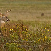 "Buck in Flowers © 2007 Nova Mackentley Laguna Atascosa NWR, TX DEF  <div class=""ss-paypal-button""><div class=""ss-paypal-add-to-cart-section""><div class=""ss-paypal-product-options""><h4>Mat Sizes</h4><ul><li><a href=""https://www.paypal.com/cgi-bin/webscr?cmd=_cart&business=T77V5VKCW4K2U&lc=US&item_name=Buck%20in%20Flowers%20%C2%A9%202007%20Nova%20Mackentley%20Laguna%20Atascosa%20NWR%2C%20TX%20DEF&item_number=http%3A%2F%2Fwww.nightflightimages.com%2FGalleries-1%2FMammals%2Fi-vh8MmBd&button_subtype=products&no_note=0&cn=Add%20special%20instructions%20to%20the%20seller%3A&no_shipping=2&currency_code=USD&weight_unit=lbs&add=1&bn=PP-ShopCartBF%3Abtn_cart_SM.gif%3ANonHosted&on0=Mat%20Sizes&option_select0=5%20x%207&option_amount0=10.00&option_select1=8%20x%2010&option_amount1=18.00&option_select2=11%20x%2014&option_amount2=28.00&option_select3=card&option_amount3=4.00&option_index=0&charset=utf-8&submit=&os0=5%20x%207"" target=""paypal""><span>5 x 7 $11.00 USD</span><img src=""https://www.paypalobjects.com/en_US/i/btn/btn_cart_SM.gif""></a></li><li><a href=""https://www.paypal.com/cgi-bin/webscr?cmd=_cart&business=T77V5VKCW4K2U&lc=US&item_name=Buck%20in%20Flowers%20%C2%A9%202007%20Nova%20Mackentley%20Laguna%20Atascosa%20NWR%2C%20TX%20DEF&item_number=http%3A%2F%2Fwww.nightflightimages.com%2FGalleries-1%2FMammals%2Fi-vh8MmBd&button_subtype=products&no_note=0&cn=Add%20special%20instructions%20to%20the%20seller%3A&no_shipping=2&currency_code=USD&weight_unit=lbs&add=1&bn=PP-ShopCartBF%3Abtn_cart_SM.gif%3ANonHosted&on0=Mat%20Sizes&option_select0=5%20x%207&option_amount0=10.00&option_select1=8%20x%2010&option_amount1=18.00&option_select2=11%20x%2014&option_amount2=28.00&option_select3=card&option_amount3=4.00&option_index=0&charset=utf-8&submit=&os0=8%20x%2010"" target=""paypal""><span>8 x 10 $19.00 USD</span><img src=""https://www.paypalobjects.com/en_US/i/btn/btn_cart_SM.gif""></a></li><li><a href=""https://www.paypal.com/cgi-bin/webscr?cmd=_cart&business=T77V5VKCW4K2U&lc=US&item_name=Buck%20in%20Flowers%20%C2%A9%202007%20Nova%20Mackentley%20Laguna%20Atascosa%20NWR%2C%20TX%20DEF&item_number=http%3A%2F%2Fwww.nightflightimages.com%2FGalleries-1%2FMammals%2Fi-vh8MmBd&button_subtype=products&no_note=0&cn=Add%20special%20instructions%20to%20the%20seller%3A&no_shipping=2&currency_code=USD&weight_unit=lbs&add=1&bn=PP-ShopCartBF%3Abtn_cart_SM.gif%3ANonHosted&on0=Mat%20Sizes&option_select0=5%20x%207&option_amount0=10.00&option_select1=8%20x%2010&option_amount1=18.00&option_select2=11%20x%2014&option_amount2=28.00&option_select3=card&option_amount3=4.00&option_index=0&charset=utf-8&submit=&os0=11%20x%2014"" target=""paypal""><span>11 x 14 $29.00 USD</span><img src=""https://www.paypalobjects.com/en_US/i/btn/btn_cart_SM.gif""></a></li><li><a href=""https://www.paypal.com/cgi-bin/webscr?cmd=_cart&business=T77V5VKCW4K2U&lc=US&item_name=Buck%20in%20Flowers%20%C2%A9%202007%20Nova%20Mackentley%20Laguna%20Atascosa%20NWR%2C%20TX%20DEF&item_number=http%3A%2F%2Fwww.nightflightimages.com%2FGalleries-1%2FMammals%2Fi-vh8MmBd&button_subtype=products&no_note=0&cn=Add%20special%20instructions%20to%20the%20seller%3A&no_shipping=2&currency_code=USD&weight_unit=lbs&add=1&bn=PP-ShopCartBF%3Abtn_cart_SM.gif%3ANonHosted&on0=Mat%20Sizes&option_select0=5%20x%207&option_amount0=10.00&option_select1=8%20x%2010&option_amount1=18.00&option_select2=11%20x%2014&option_amount2=28.00&option_select3=card&option_amount3=4.00&option_index=0&charset=utf-8&submit=&os0=card"" target=""paypal""><span>card $5.00 USD</span><img src=""https://www.paypalobjects.com/en_US/i/btn/btn_cart_SM.gif""></a></li></ul></div></div> <div class=""ss-paypal-view-cart-section""><a href=""https://www.paypal.com/cgi-bin/webscr?cmd=_cart&business=T77V5VKCW4K2U&display=1&item_name=Buck%20in%20Flowers%20%C2%A9%202007%20Nova%20Mackentley%20Laguna%20Atascosa%20NWR%2C%20TX%20DEF&item_number=http%3A%2F%2Fwww.nightflightimages.com%2FGalleries-1%2FMammals%2Fi-vh8MmBd&charset=utf-8&submit="" target=""paypal"" class=""ss-paypal-submit-button""><img src=""https://www.paypalobjects.com/en_US/i/btn/btn_viewcart_LG.gif""></a></div></div><div class=""ss-paypal-button-end""></div>"