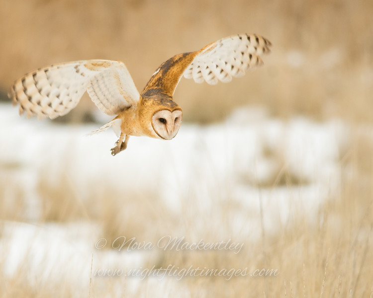 """Barn Owl hunting © 2017 Nova Mackentley Northern UT BNS  <div class=""""ss-paypal-button""""><div class=""""ss-paypal-add-to-cart-section""""><div class=""""ss-paypal-product-options""""><h4>Mat Sizes</h4><ul><li><a href=""""https://www.paypal.com/cgi-bin/webscr?cmd=_cart&business=T77V5VKCW4K2U&lc=US&item_name=Barn%20Owl%20hunting%20%C2%A9%202017%20Nova%20Mackentley%20Northern%20UT%20BNS&item_number=http%3A%2F%2Fwww.nightflightimages.com%2FGalleries-1%2FNew%2Fi-8vCDmTc&button_subtype=products&no_note=0&cn=Add%20special%20instructions%20to%20the%20seller%3A&no_shipping=2&currency_code=USD&weight_unit=lbs&add=1&bn=PP-ShopCartBF%3Abtn_cart_SM.gif%3ANonHosted&on0=Mat%20Sizes&option_select0=5%20x%207&option_amount0=10.00&option_select1=8%20x%2010&option_amount1=18.00&option_select2=11%20x%2014&option_amount2=28.00&option_select3=card&option_amount3=4.00&option_index=0&charset=utf-8&submit=&os0=5%20x%207"""" target=""""paypal""""><span>5 x 7 $11.00 USD</span><img src=""""https://www.paypalobjects.com/en_US/i/btn/btn_cart_SM.gif""""></a></li><li><a href=""""https://www.paypal.com/cgi-bin/webscr?cmd=_cart&business=T77V5VKCW4K2U&lc=US&item_name=Barn%20Owl%20hunting%20%C2%A9%202017%20Nova%20Mackentley%20Northern%20UT%20BNS&item_number=http%3A%2F%2Fwww.nightflightimages.com%2FGalleries-1%2FNew%2Fi-8vCDmTc&button_subtype=products&no_note=0&cn=Add%20special%20instructions%20to%20the%20seller%3A&no_shipping=2&currency_code=USD&weight_unit=lbs&add=1&bn=PP-ShopCartBF%3Abtn_cart_SM.gif%3ANonHosted&on0=Mat%20Sizes&option_select0=5%20x%207&option_amount0=10.00&option_select1=8%20x%2010&option_amount1=18.00&option_select2=11%20x%2014&option_amount2=28.00&option_select3=card&option_amount3=4.00&option_index=0&charset=utf-8&submit=&os0=8%20x%2010"""" target=""""paypal""""><span>8 x 10 $19.00 USD</span><img src=""""https://www.paypalobjects.com/en_US/i/btn/btn_cart_SM.gif""""></a></li><li><a href=""""https://www.paypal.com/cgi-bin/webscr?cmd=_cart&business=T77V5VKCW4K2U&lc=US&item_name=Barn%20Owl%20hunting%20%C2%A9%202017%20Nova%20Mackentley%20"""
