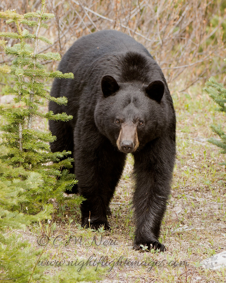 """Black Bear © 2017 Chris M Neri Icefields Parkway, AB BLBE  <div class=""""ss-paypal-button""""><div class=""""ss-paypal-add-to-cart-section""""><div class=""""ss-paypal-product-options""""><h4>Mat Sizes</h4><ul><li><a href=""""https://www.paypal.com/cgi-bin/webscr?cmd=_cart&business=T77V5VKCW4K2U&lc=US&item_name=Black%20Bear%20%C2%A9%202017%20Chris%20M%20Neri%20Icefields%20Parkway%2C%20AB%20BLBE&item_number=http%3A%2F%2Fwww.nightflightimages.com%2FGalleries-1%2FNew%2Fi-BLjXhk9&button_subtype=products&no_note=0&cn=Add%20special%20instructions%20to%20the%20seller%3A&no_shipping=2&currency_code=USD&weight_unit=lbs&add=1&bn=PP-ShopCartBF%3Abtn_cart_SM.gif%3ANonHosted&on0=Mat%20Sizes&option_select0=5%20x%207&option_amount0=12.00&option_select1=8%20x%2010&option_amount1=19.00&option_select2=11%20x%2014&option_amount2=29.00&option_select3=card&option_amount3=5.00&option_index=0&charset=utf-8&submit=&os0=5%20x%207"""" target=""""paypal""""><span>5 x 7 $12.00 USD</span><img src=""""https://www.paypalobjects.com/en_US/i/btn/btn_cart_SM.gif""""></a></li><li><a href=""""https://www.paypal.com/cgi-bin/webscr?cmd=_cart&business=T77V5VKCW4K2U&lc=US&item_name=Black%20Bear%20%C2%A9%202017%20Chris%20M%20Neri%20Icefields%20Parkway%2C%20AB%20BLBE&item_number=http%3A%2F%2Fwww.nightflightimages.com%2FGalleries-1%2FNew%2Fi-BLjXhk9&button_subtype=products&no_note=0&cn=Add%20special%20instructions%20to%20the%20seller%3A&no_shipping=2&currency_code=USD&weight_unit=lbs&add=1&bn=PP-ShopCartBF%3Abtn_cart_SM.gif%3ANonHosted&on0=Mat%20Sizes&option_select0=5%20x%207&option_amount0=12.00&option_select1=8%20x%2010&option_amount1=19.00&option_select2=11%20x%2014&option_amount2=29.00&option_select3=card&option_amount3=5.00&option_index=0&charset=utf-8&submit=&os0=8%20x%2010"""" target=""""paypal""""><span>8 x 10 $19.00 USD</span><img src=""""https://www.paypalobjects.com/en_US/i/btn/btn_cart_SM.gif""""></a></li><li><a href=""""https://www.paypal.com/cgi-bin/webscr?cmd=_cart&business=T77V5VKCW4K2U&lc=US&item_name=Black%20Bear%20%C2%A9%202017%20Chris%20M%20Ne"""