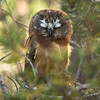 "Northern Saw-whet Owl © 2016 Chris M Neri Whitefish Point, MI NS172  <div class=""ss-paypal-button""><div class=""ss-paypal-add-to-cart-section""><div class=""ss-paypal-product-options""><h4>Mat Sizes</h4><ul><li><a href=""https://www.paypal.com/cgi-bin/webscr?cmd=_cart&business=T77V5VKCW4K2U&lc=US&item_name=Northern%20Saw-whet%20Owl%20%C2%A9%202016%20Chris%20M%20Neri%20Whitefish%20Point%2C%20MI%20NS172&item_number=http%3A%2F%2Fwww.nightflightimages.com%2FGalleries-1%2FNew%2Fi-H3bkrvC&button_subtype=products&no_note=0&cn=Add%20special%20instructions%20to%20the%20seller%3A&no_shipping=2&currency_code=USD&weight_unit=lbs&add=1&bn=PP-ShopCartBF%3Abtn_cart_SM.gif%3ANonHosted&on0=Mat%20Sizes&option_select0=5%20x%207&option_amount0=12.00&option_select1=8%20x%2010&option_amount1=19.00&option_select2=11%20x%2014&option_amount2=29.00&option_select3=card&option_amount3=5.00&option_index=0&charset=utf-8&submit=&os0=5%20x%207"" target=""paypal""><span>5 x 7 $12.00 USD</span><img src=""https://www.paypalobjects.com/en_US/i/btn/btn_cart_SM.gif""></a></li><li><a href=""https://www.paypal.com/cgi-bin/webscr?cmd=_cart&business=T77V5VKCW4K2U&lc=US&item_name=Northern%20Saw-whet%20Owl%20%C2%A9%202016%20Chris%20M%20Neri%20Whitefish%20Point%2C%20MI%20NS172&item_number=http%3A%2F%2Fwww.nightflightimages.com%2FGalleries-1%2FNew%2Fi-H3bkrvC&button_subtype=products&no_note=0&cn=Add%20special%20instructions%20to%20the%20seller%3A&no_shipping=2&currency_code=USD&weight_unit=lbs&add=1&bn=PP-ShopCartBF%3Abtn_cart_SM.gif%3ANonHosted&on0=Mat%20Sizes&option_select0=5%20x%207&option_amount0=12.00&option_select1=8%20x%2010&option_amount1=19.00&option_select2=11%20x%2014&option_amount2=29.00&option_select3=card&option_amount3=5.00&option_index=0&charset=utf-8&submit=&os0=8%20x%2010"" target=""paypal""><span>8 x 10 $19.00 USD</span><img src=""https://www.paypalobjects.com/en_US/i/btn/btn_cart_SM.gif""></a></li><li><a href=""https://www.paypal.com/cgi-bin/webscr?cmd=_cart&business=T77V5VKCW4K2U&lc=US&item_name=Northern%20Saw-whet%20Owl%20%C2%A9%202016%20Chris%20M%20Neri%20Whitefish%20Point%2C%20MI%20NS172&item_number=http%3A%2F%2Fwww.nightflightimages.com%2FGalleries-1%2FNew%2Fi-H3bkrvC&button_subtype=products&no_note=0&cn=Add%20special%20instructions%20to%20the%20seller%3A&no_shipping=2&currency_code=USD&weight_unit=lbs&add=1&bn=PP-ShopCartBF%3Abtn_cart_SM.gif%3ANonHosted&on0=Mat%20Sizes&option_select0=5%20x%207&option_amount0=12.00&option_select1=8%20x%2010&option_amount1=19.00&option_select2=11%20x%2014&option_amount2=29.00&option_select3=card&option_amount3=5.00&option_index=0&charset=utf-8&submit=&os0=11%20x%2014"" target=""paypal""><span>11 x 14 $29.00 USD</span><img src=""https://www.paypalobjects.com/en_US/i/btn/btn_cart_SM.gif""></a></li><li><a href=""https://www.paypal.com/cgi-bin/webscr?cmd=_cart&business=T77V5VKCW4K2U&lc=US&item_name=Northern%20Saw-whet%20Owl%20%C2%A9%202016%20Chris%20M%20Neri%20Whitefish%20Point%2C%20MI%20NS172&item_number=http%3A%2F%2Fwww.nightflightimages.com%2FGalleries-1%2FNew%2Fi-H3bkrvC&button_subtype=products&no_note=0&cn=Add%20special%20instructions%20to%20the%20seller%3A&no_shipping=2&currency_code=USD&weight_unit=lbs&add=1&bn=PP-ShopCartBF%3Abtn_cart_SM.gif%3ANonHosted&on0=Mat%20Sizes&option_select0=5%20x%207&option_amount0=12.00&option_select1=8%20x%2010&option_amount1=19.00&option_select2=11%20x%2014&option_amount2=29.00&option_select3=card&option_amount3=5.00&option_index=0&charset=utf-8&submit=&os0=card"" target=""paypal""><span>card $5.00 USD</span><img src=""https://www.paypalobjects.com/en_US/i/btn/btn_cart_SM.gif""></a></li></ul></div></div> <div class=""ss-paypal-view-cart-section""><a href=""https://www.paypal.com/cgi-bin/webscr?cmd=_cart&business=T77V5VKCW4K2U&display=1&item_name=Northern%20Saw-whet%20Owl%20%C2%A9%202016%20Chris%20M%20Neri%20Whitefish%20Point%2C%20MI%20NS172&item_number=http%3A%2F%2Fwww.nightflightimages.com%2FGalleries-1%2FNew%2Fi-H3bkrvC&charset=utf-8&submit="" target=""paypal"" class=""ss-paypal-submit-button""><img src=""https://www.paypalobjects.com/en_US/i/btn/btn_viewcart_LG.gif""></a></div></div><div class=""ss-paypal-button-end""></div>"