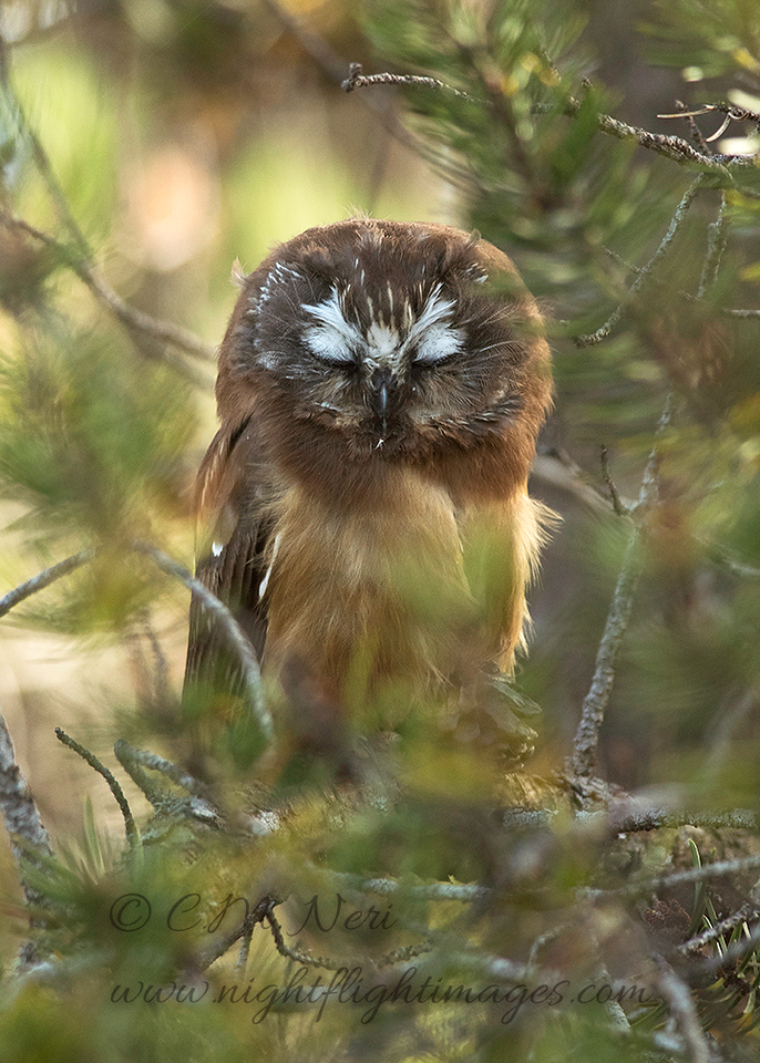 """Northern Saw-whet Owl © 2016 Chris M Neri Whitefish Point, MI NS172  <div class=""""ss-paypal-button""""><div class=""""ss-paypal-add-to-cart-section""""><div class=""""ss-paypal-product-options""""><h4>Mat Sizes</h4><ul><li><a href=""""https://www.paypal.com/cgi-bin/webscr?cmd=_cart&business=T77V5VKCW4K2U&lc=US&item_name=Northern%20Saw-whet%20Owl%20%C2%A9%202016%20Chris%20M%20Neri%20Whitefish%20Point%2C%20MI%20NS172&item_number=http%3A%2F%2Fwww.nightflightimages.com%2FGalleries-1%2FNew%2Fi-H3bkrvC&button_subtype=products&no_note=0&cn=Add%20special%20instructions%20to%20the%20seller%3A&no_shipping=2&currency_code=USD&weight_unit=lbs&add=1&bn=PP-ShopCartBF%3Abtn_cart_SM.gif%3ANonHosted&on0=Mat%20Sizes&option_select0=5%20x%207&option_amount0=12.00&option_select1=8%20x%2010&option_amount1=19.00&option_select2=11%20x%2014&option_amount2=29.00&option_select3=card&option_amount3=5.00&option_index=0&charset=utf-8&submit=&os0=5%20x%207"""" target=""""paypal""""><span>5 x 7 $12.00 USD</span><img src=""""https://www.paypalobjects.com/en_US/i/btn/btn_cart_SM.gif""""></a></li><li><a href=""""https://www.paypal.com/cgi-bin/webscr?cmd=_cart&business=T77V5VKCW4K2U&lc=US&item_name=Northern%20Saw-whet%20Owl%20%C2%A9%202016%20Chris%20M%20Neri%20Whitefish%20Point%2C%20MI%20NS172&item_number=http%3A%2F%2Fwww.nightflightimages.com%2FGalleries-1%2FNew%2Fi-H3bkrvC&button_subtype=products&no_note=0&cn=Add%20special%20instructions%20to%20the%20seller%3A&no_shipping=2&currency_code=USD&weight_unit=lbs&add=1&bn=PP-ShopCartBF%3Abtn_cart_SM.gif%3ANonHosted&on0=Mat%20Sizes&option_select0=5%20x%207&option_amount0=12.00&option_select1=8%20x%2010&option_amount1=19.00&option_select2=11%20x%2014&option_amount2=29.00&option_select3=card&option_amount3=5.00&option_index=0&charset=utf-8&submit=&os0=8%20x%2010"""" target=""""paypal""""><span>8 x 10 $19.00 USD</span><img src=""""https://www.paypalobjects.com/en_US/i/btn/btn_cart_SM.gif""""></a></li><li><a href=""""https://www.paypal.com/cgi-bin/webscr?cmd=_cart&business=T77V5VKCW4K2U&lc=US&item_name=Northern%20"""