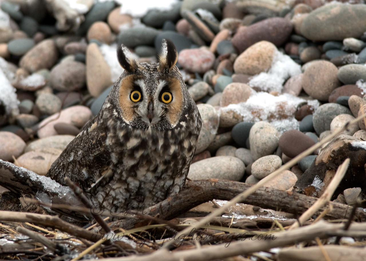 """Long-eared Owl © 2017 Chris M Neri Whitefish Point, MI LEOW17  <div class=""""ss-paypal-button""""><div class=""""ss-paypal-add-to-cart-section""""><div class=""""ss-paypal-product-options""""><h4>Mat Sizes</h4><ul><li><a href=""""https://www.paypal.com/cgi-bin/webscr?cmd=_cart&business=T77V5VKCW4K2U&lc=US&item_name=Long-eared%20Owl%20%C2%A9%202017%20Chris%20M%20Neri%20Whitefish%20Point%2C%20MI%20LEOW17&item_number=http%3A%2F%2Fwww.nightflightimages.com%2FGalleries-1%2FNew%2Fi-HqVgN49&button_subtype=products&no_note=0&cn=Add%20special%20instructions%20to%20the%20seller%3A&no_shipping=2&currency_code=USD&weight_unit=lbs&add=1&bn=PP-ShopCartBF%3Abtn_cart_SM.gif%3ANonHosted&on0=Mat%20Sizes&option_select0=5%20x%207&option_amount0=12.00&option_select1=8%20x%2010&option_amount1=19.00&option_select2=11%20x%2014&option_amount2=29.00&option_select3=card&option_amount3=5.00&option_index=0&charset=utf-8&submit=&os0=5%20x%207"""" target=""""paypal""""><span>5 x 7 $12.00 USD</span><img src=""""https://www.paypalobjects.com/en_US/i/btn/btn_cart_SM.gif""""></a></li><li><a href=""""https://www.paypal.com/cgi-bin/webscr?cmd=_cart&business=T77V5VKCW4K2U&lc=US&item_name=Long-eared%20Owl%20%C2%A9%202017%20Chris%20M%20Neri%20Whitefish%20Point%2C%20MI%20LEOW17&item_number=http%3A%2F%2Fwww.nightflightimages.com%2FGalleries-1%2FNew%2Fi-HqVgN49&button_subtype=products&no_note=0&cn=Add%20special%20instructions%20to%20the%20seller%3A&no_shipping=2&currency_code=USD&weight_unit=lbs&add=1&bn=PP-ShopCartBF%3Abtn_cart_SM.gif%3ANonHosted&on0=Mat%20Sizes&option_select0=5%20x%207&option_amount0=12.00&option_select1=8%20x%2010&option_amount1=19.00&option_select2=11%20x%2014&option_amount2=29.00&option_select3=card&option_amount3=5.00&option_index=0&charset=utf-8&submit=&os0=8%20x%2010"""" target=""""paypal""""><span>8 x 10 $19.00 USD</span><img src=""""https://www.paypalobjects.com/en_US/i/btn/btn_cart_SM.gif""""></a></li><li><a href=""""https://www.paypal.com/cgi-bin/webscr?cmd=_cart&business=T77V5VKCW4K2U&lc=US&item_name=Long-eared%20Owl%20%C2%A9%202017%"""