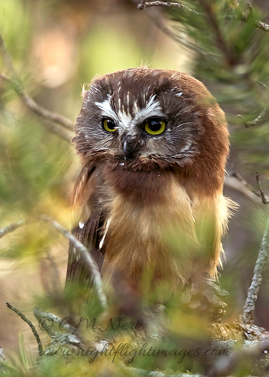 """Northern Saw-whet Owl © 2016 Chris M Neri Whitefish Point, MI NS17  <div class=""""ss-paypal-button""""><div class=""""ss-paypal-add-to-cart-section""""><div class=""""ss-paypal-product-options""""><h4>Mat Sizes</h4><ul><li><a href=""""https://www.paypal.com/cgi-bin/webscr?cmd=_cart&business=T77V5VKCW4K2U&lc=US&item_name=Northern%20Saw-whet%20Owl%20%C2%A9%202016%20Chris%20M%20Neri%20Whitefish%20Point%2C%20MI%20NS17&item_number=http%3A%2F%2Fwww.nightflightimages.com%2FGalleries-1%2FNew%2Fi-JQfZH8h&button_subtype=products&no_note=0&cn=Add%20special%20instructions%20to%20the%20seller%3A&no_shipping=2&currency_code=USD&weight_unit=lbs&add=1&bn=PP-ShopCartBF%3Abtn_cart_SM.gif%3ANonHosted&on0=Mat%20Sizes&option_select0=5%20x%207&option_amount0=12.00&option_select1=8%20x%2010&option_amount1=19.00&option_select2=11%20x%2014&option_amount2=29.00&option_select3=card&option_amount3=5.00&option_index=0&charset=utf-8&submit=&os0=5%20x%207"""" target=""""paypal""""><span>5 x 7 $12.00 USD</span><img src=""""https://www.paypalobjects.com/en_US/i/btn/btn_cart_SM.gif""""></a></li><li><a href=""""https://www.paypal.com/cgi-bin/webscr?cmd=_cart&business=T77V5VKCW4K2U&lc=US&item_name=Northern%20Saw-whet%20Owl%20%C2%A9%202016%20Chris%20M%20Neri%20Whitefish%20Point%2C%20MI%20NS17&item_number=http%3A%2F%2Fwww.nightflightimages.com%2FGalleries-1%2FNew%2Fi-JQfZH8h&button_subtype=products&no_note=0&cn=Add%20special%20instructions%20to%20the%20seller%3A&no_shipping=2&currency_code=USD&weight_unit=lbs&add=1&bn=PP-ShopCartBF%3Abtn_cart_SM.gif%3ANonHosted&on0=Mat%20Sizes&option_select0=5%20x%207&option_amount0=12.00&option_select1=8%20x%2010&option_amount1=19.00&option_select2=11%20x%2014&option_amount2=29.00&option_select3=card&option_amount3=5.00&option_index=0&charset=utf-8&submit=&os0=8%20x%2010"""" target=""""paypal""""><span>8 x 10 $19.00 USD</span><img src=""""https://www.paypalobjects.com/en_US/i/btn/btn_cart_SM.gif""""></a></li><li><a href=""""https://www.paypal.com/cgi-bin/webscr?cmd=_cart&business=T77V5VKCW4K2U&lc=US&item_name=Northern%20Saw"""