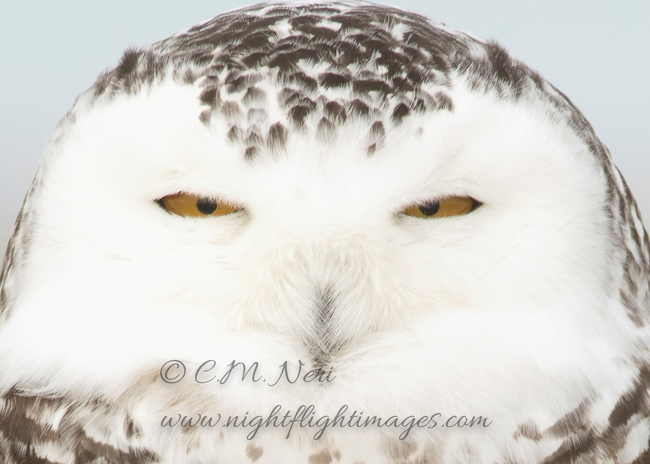 """Snowy Owl © 2017 Chris M Neri Whitefish Point, MI SNHS  <div class=""""ss-paypal-button""""><div class=""""ss-paypal-add-to-cart-section""""><div class=""""ss-paypal-product-options""""><h4>Mat Sizes</h4><ul><li><a href=""""https://www.paypal.com/cgi-bin/webscr?cmd=_cart&business=T77V5VKCW4K2U&lc=US&item_name=Snowy%20Owl%20%C2%A9%202017%20Chris%20M%20Neri%20Whitefish%20Point%2C%20MI%20SNHS&item_number=http%3A%2F%2Fwww.nightflightimages.com%2FGalleries-1%2FNew%2Fi-MMMNXnB&button_subtype=products&no_note=0&cn=Add%20special%20instructions%20to%20the%20seller%3A&no_shipping=2&currency_code=USD&weight_unit=lbs&add=1&bn=PP-ShopCartBF%3Abtn_cart_SM.gif%3ANonHosted&on0=Mat%20Sizes&option_select0=5%20x%207&option_amount0=12.00&option_select1=8%20x%2010&option_amount1=19.00&option_select2=11%20x%2014&option_amount2=29.00&option_select3=card&option_amount3=5.00&option_index=0&charset=utf-8&submit=&os0=5%20x%207"""" target=""""paypal""""><span>5 x 7 $12.00 USD</span><img src=""""https://www.paypalobjects.com/en_US/i/btn/btn_cart_SM.gif""""></a></li><li><a href=""""https://www.paypal.com/cgi-bin/webscr?cmd=_cart&business=T77V5VKCW4K2U&lc=US&item_name=Snowy%20Owl%20%C2%A9%202017%20Chris%20M%20Neri%20Whitefish%20Point%2C%20MI%20SNHS&item_number=http%3A%2F%2Fwww.nightflightimages.com%2FGalleries-1%2FNew%2Fi-MMMNXnB&button_subtype=products&no_note=0&cn=Add%20special%20instructions%20to%20the%20seller%3A&no_shipping=2&currency_code=USD&weight_unit=lbs&add=1&bn=PP-ShopCartBF%3Abtn_cart_SM.gif%3ANonHosted&on0=Mat%20Sizes&option_select0=5%20x%207&option_amount0=12.00&option_select1=8%20x%2010&option_amount1=19.00&option_select2=11%20x%2014&option_amount2=29.00&option_select3=card&option_amount3=5.00&option_index=0&charset=utf-8&submit=&os0=8%20x%2010"""" target=""""paypal""""><span>8 x 10 $19.00 USD</span><img src=""""https://www.paypalobjects.com/en_US/i/btn/btn_cart_SM.gif""""></a></li><li><a href=""""https://www.paypal.com/cgi-bin/webscr?cmd=_cart&business=T77V5VKCW4K2U&lc=US&item_name=Snowy%20Owl%20%C2%A9%202017%20Chris%20M%20Neri%20White"""