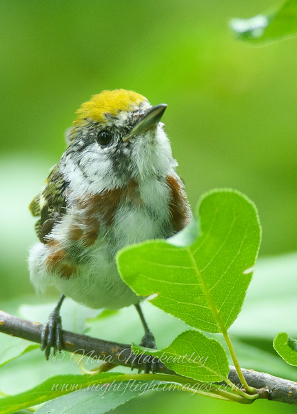 """Chestnut-sided Warbler love © 2016 Nova Mackentley Ely, MN CSH  <div class=""""ss-paypal-button""""><div class=""""ss-paypal-add-to-cart-section""""><div class=""""ss-paypal-product-options""""><h4>Mat Sizes</h4><ul><li><a href=""""https://www.paypal.com/cgi-bin/webscr?cmd=_cart&business=T77V5VKCW4K2U&lc=US&item_name=Chestnut-sided%20Warbler%20love%20%C2%A9%202016%20Nova%20Mackentley%20Ely%2C%20MN%20CSH&item_number=http%3A%2F%2Fwww.nightflightimages.com%2FGalleries-1%2FWarbler%2Fi-MzKc9CD&button_subtype=products&no_note=0&cn=Add%20special%20instructions%20to%20the%20seller%3A&no_shipping=2&currency_code=USD&weight_unit=lbs&add=1&bn=PP-ShopCartBF%3Abtn_cart_SM.gif%3ANonHosted&on0=Mat%20Sizes&option_select0=5%20x%207&option_amount0=10.00&option_select1=8%20x%2010&option_amount1=18.00&option_select2=11%20x%2014&option_amount2=28.00&option_select3=card&option_amount3=4.00&option_index=0&charset=utf-8&submit=&os0=5%20x%207"""" target=""""paypal""""><span>5 x 7 $11.00 USD</span><img src=""""https://www.paypalobjects.com/en_US/i/btn/btn_cart_SM.gif""""></a></li><li><a href=""""https://www.paypal.com/cgi-bin/webscr?cmd=_cart&business=T77V5VKCW4K2U&lc=US&item_name=Chestnut-sided%20Warbler%20love%20%C2%A9%202016%20Nova%20Mackentley%20Ely%2C%20MN%20CSH&item_number=http%3A%2F%2Fwww.nightflightimages.com%2FGalleries-1%2FWarbler%2Fi-MzKc9CD&button_subtype=products&no_note=0&cn=Add%20special%20instructions%20to%20the%20seller%3A&no_shipping=2&currency_code=USD&weight_unit=lbs&add=1&bn=PP-ShopCartBF%3Abtn_cart_SM.gif%3ANonHosted&on0=Mat%20Sizes&option_select0=5%20x%207&option_amount0=10.00&option_select1=8%20x%2010&option_amount1=18.00&option_select2=11%20x%2014&option_amount2=28.00&option_select3=card&option_amount3=4.00&option_index=0&charset=utf-8&submit=&os0=8%20x%2010"""" target=""""paypal""""><span>8 x 10 $19.00 USD</span><img src=""""https://www.paypalobjects.com/en_US/i/btn/btn_cart_SM.gif""""></a></li><li><a href=""""https://www.paypal.com/cgi-bin/webscr?cmd=_cart&business=T77V5VKCW4K2U&lc=US&item_name=Chestnut-sided%20Warbler%2"""