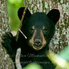 "Bear cub face © 2015 Nova Mackentley, Somewhere in WI.  BCF  <div class=""ss-paypal-button""><div class=""ss-paypal-add-to-cart-section""><div class=""ss-paypal-product-options""><h4>Mat Sizes</h4><ul><li><a href=""https://www.paypal.com/cgi-bin/webscr?cmd=_cart&business=T77V5VKCW4K2U&lc=US&item_name=Bear%20cub%20face%20%C2%A9%202015%20Nova%20Mackentley%2C%20Somewhere%20in%20WI.%20%20BCF&item_number=http%3A%2F%2Fwww.nightflightimages.com%2FGalleries-1%2FMammals%2Fi-TszJqD2&button_subtype=products&no_note=0&cn=Add%20special%20instructions%20to%20the%20seller%3A&no_shipping=2&currency_code=USD&weight_unit=lbs&add=1&bn=PP-ShopCartBF%3Abtn_cart_SM.gif%3ANonHosted&on0=Mat%20Sizes&option_select0=5%20x%207&option_amount0=10.00&option_select1=8%20x%2010&option_amount1=18.00&option_select2=11%20x%2014&option_amount2=28.00&option_select3=card&option_amount3=4.00&option_index=0&charset=utf-8&submit=&os0=5%20x%207"" target=""paypal""><span>5 x 7 $11.00 USD</span><img src=""https://www.paypalobjects.com/en_US/i/btn/btn_cart_SM.gif""></a></li><li><a href=""https://www.paypal.com/cgi-bin/webscr?cmd=_cart&business=T77V5VKCW4K2U&lc=US&item_name=Bear%20cub%20face%20%C2%A9%202015%20Nova%20Mackentley%2C%20Somewhere%20in%20WI.%20%20BCF&item_number=http%3A%2F%2Fwww.nightflightimages.com%2FGalleries-1%2FMammals%2Fi-TszJqD2&button_subtype=products&no_note=0&cn=Add%20special%20instructions%20to%20the%20seller%3A&no_shipping=2&currency_code=USD&weight_unit=lbs&add=1&bn=PP-ShopCartBF%3Abtn_cart_SM.gif%3ANonHosted&on0=Mat%20Sizes&option_select0=5%20x%207&option_amount0=10.00&option_select1=8%20x%2010&option_amount1=18.00&option_select2=11%20x%2014&option_amount2=28.00&option_select3=card&option_amount3=4.00&option_index=0&charset=utf-8&submit=&os0=8%20x%2010"" target=""paypal""><span>8 x 10 $19.00 USD</span><img src=""https://www.paypalobjects.com/en_US/i/btn/btn_cart_SM.gif""></a></li><li><a href=""https://www.paypal.com/cgi-bin/webscr?cmd=_cart&business=T77V5VKCW4K2U&lc=US&item_name=Bear%20cub%20face%20%C2%A9%202015%20Nova%20Mackentley%2C%20Somewhere%20in%20WI.%20%20BCF&item_number=http%3A%2F%2Fwww.nightflightimages.com%2FGalleries-1%2FMammals%2Fi-TszJqD2&button_subtype=products&no_note=0&cn=Add%20special%20instructions%20to%20the%20seller%3A&no_shipping=2&currency_code=USD&weight_unit=lbs&add=1&bn=PP-ShopCartBF%3Abtn_cart_SM.gif%3ANonHosted&on0=Mat%20Sizes&option_select0=5%20x%207&option_amount0=10.00&option_select1=8%20x%2010&option_amount1=18.00&option_select2=11%20x%2014&option_amount2=28.00&option_select3=card&option_amount3=4.00&option_index=0&charset=utf-8&submit=&os0=11%20x%2014"" target=""paypal""><span>11 x 14 $29.00 USD</span><img src=""https://www.paypalobjects.com/en_US/i/btn/btn_cart_SM.gif""></a></li><li><a href=""https://www.paypal.com/cgi-bin/webscr?cmd=_cart&business=T77V5VKCW4K2U&lc=US&item_name=Bear%20cub%20face%20%C2%A9%202015%20Nova%20Mackentley%2C%20Somewhere%20in%20WI.%20%20BCF&item_number=http%3A%2F%2Fwww.nightflightimages.com%2FGalleries-1%2FMammals%2Fi-TszJqD2&button_subtype=products&no_note=0&cn=Add%20special%20instructions%20to%20the%20seller%3A&no_shipping=2&currency_code=USD&weight_unit=lbs&add=1&bn=PP-ShopCartBF%3Abtn_cart_SM.gif%3ANonHosted&on0=Mat%20Sizes&option_select0=5%20x%207&option_amount0=10.00&option_select1=8%20x%2010&option_amount1=18.00&option_select2=11%20x%2014&option_amount2=28.00&option_select3=card&option_amount3=4.00&option_index=0&charset=utf-8&submit=&os0=card"" target=""paypal""><span>card $5.00 USD</span><img src=""https://www.paypalobjects.com/en_US/i/btn/btn_cart_SM.gif""></a></li></ul></div></div> <div class=""ss-paypal-view-cart-section""><a href=""https://www.paypal.com/cgi-bin/webscr?cmd=_cart&business=T77V5VKCW4K2U&display=1&item_name=Bear%20cub%20face%20%C2%A9%202015%20Nova%20Mackentley%2C%20Somewhere%20in%20WI.%20%20BCF&item_number=http%3A%2F%2Fwww.nightflightimages.com%2FGalleries-1%2FMammals%2Fi-TszJqD2&charset=utf-8&submit="" target=""paypal"" class=""ss-paypal-submit-button""><img src=""https://www.paypalobjects.com/en_US/i/btn/btn_viewcart_LG.gif""></a></div></div><div class=""ss-paypal-button-end""></div>"