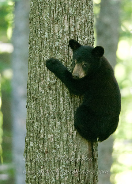 """Bear cub © 2015 Nova Mackentley, Somewhere in WI.  BCU  <div class=""""ss-paypal-button""""><div class=""""ss-paypal-add-to-cart-section""""><div class=""""ss-paypal-product-options""""><h4>Mat Sizes</h4><ul><li><a href=""""https://www.paypal.com/cgi-bin/webscr?cmd=_cart&business=T77V5VKCW4K2U&lc=US&item_name=Bear%20cub%20%C2%A9%202015%20Nova%20Mackentley%2C%20Somewhere%20in%20WI.%20%20BCU&item_number=http%3A%2F%2Fwww.nightflightimages.com%2FGalleries-1%2FMammals%2Fi-XmKmZkc&button_subtype=products&no_note=0&cn=Add%20special%20instructions%20to%20the%20seller%3A&no_shipping=2&currency_code=USD&weight_unit=lbs&add=1&bn=PP-ShopCartBF%3Abtn_cart_SM.gif%3ANonHosted&on0=Mat%20Sizes&option_select0=5%20x%207&option_amount0=10.00&option_select1=8%20x%2010&option_amount1=18.00&option_select2=11%20x%2014&option_amount2=28.00&option_select3=card&option_amount3=4.00&option_index=0&charset=utf-8&submit=&os0=5%20x%207"""" target=""""paypal""""><span>5 x 7 $11.00 USD</span><img src=""""https://www.paypalobjects.com/en_US/i/btn/btn_cart_SM.gif""""></a></li><li><a href=""""https://www.paypal.com/cgi-bin/webscr?cmd=_cart&business=T77V5VKCW4K2U&lc=US&item_name=Bear%20cub%20%C2%A9%202015%20Nova%20Mackentley%2C%20Somewhere%20in%20WI.%20%20BCU&item_number=http%3A%2F%2Fwww.nightflightimages.com%2FGalleries-1%2FMammals%2Fi-XmKmZkc&button_subtype=products&no_note=0&cn=Add%20special%20instructions%20to%20the%20seller%3A&no_shipping=2&currency_code=USD&weight_unit=lbs&add=1&bn=PP-ShopCartBF%3Abtn_cart_SM.gif%3ANonHosted&on0=Mat%20Sizes&option_select0=5%20x%207&option_amount0=10.00&option_select1=8%20x%2010&option_amount1=18.00&option_select2=11%20x%2014&option_amount2=28.00&option_select3=card&option_amount3=4.00&option_index=0&charset=utf-8&submit=&os0=8%20x%2010"""" target=""""paypal""""><span>8 x 10 $19.00 USD</span><img src=""""https://www.paypalobjects.com/en_US/i/btn/btn_cart_SM.gif""""></a></li><li><a href=""""https://www.paypal.com/cgi-bin/webscr?cmd=_cart&business=T77V5VKCW4K2U&lc=US&item_name=Bear%20cub%20%C2%A9%202015%20Nova%20Mackentley"""