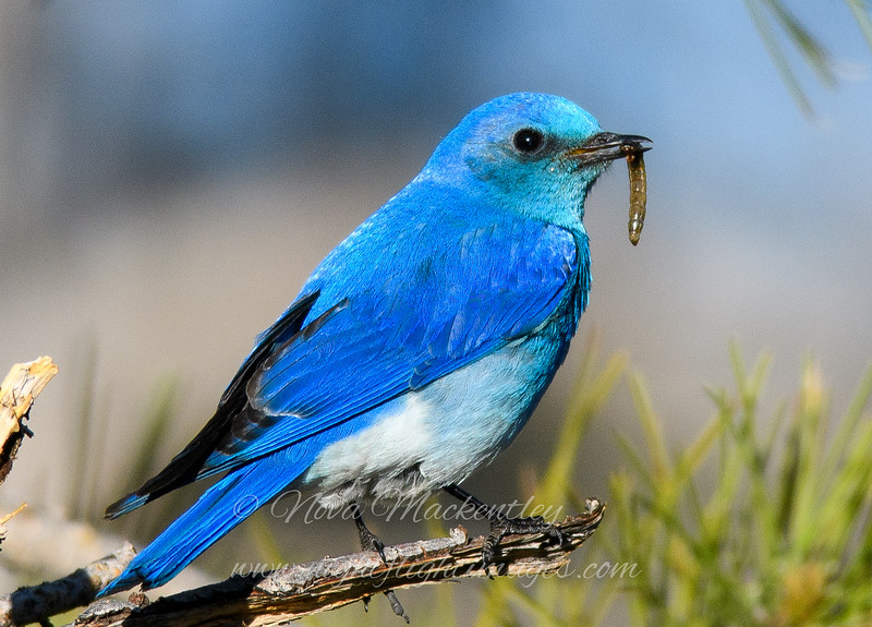 """Mountain Bluebird with worm © 2016 Nova Mackentley Rocky Mtn NP, CO MTN  <div class=""""ss-paypal-button""""><div class=""""ss-paypal-add-to-cart-section""""><div class=""""ss-paypal-product-options""""><h4>Mat Sizes</h4><ul><li><a href=""""https://www.paypal.com/cgi-bin/webscr?cmd=_cart&business=T77V5VKCW4K2U&lc=US&item_name=Mountain%20Bluebird%20with%20worm%20%C2%A9%202016%20Nova%20Mackentley%20Rocky%20Mtn%20NP%2C%20CO%20MTN&item_number=http%3A%2F%2Fwww.nightflightimages.com%2FGalleries-1%2FTravels%2Fi-d4xKtxX&button_subtype=products&no_note=0&cn=Add%20special%20instructions%20to%20the%20seller%3A&no_shipping=2&currency_code=USD&weight_unit=lbs&add=1&bn=PP-ShopCartBF%3Abtn_cart_SM.gif%3ANonHosted&on0=Mat%20Sizes&option_select0=5%20x%207&option_amount0=10.00&option_select1=8%20x%2010&option_amount1=18.00&option_select2=11%20x%2014&option_amount2=28.00&option_select3=card&option_amount3=4.00&option_index=0&charset=utf-8&submit=&os0=5%20x%207"""" target=""""paypal""""><span>5 x 7 $11.00 USD</span><img src=""""https://www.paypalobjects.com/en_US/i/btn/btn_cart_SM.gif""""></a></li><li><a href=""""https://www.paypal.com/cgi-bin/webscr?cmd=_cart&business=T77V5VKCW4K2U&lc=US&item_name=Mountain%20Bluebird%20with%20worm%20%C2%A9%202016%20Nova%20Mackentley%20Rocky%20Mtn%20NP%2C%20CO%20MTN&item_number=http%3A%2F%2Fwww.nightflightimages.com%2FGalleries-1%2FTravels%2Fi-d4xKtxX&button_subtype=products&no_note=0&cn=Add%20special%20instructions%20to%20the%20seller%3A&no_shipping=2&currency_code=USD&weight_unit=lbs&add=1&bn=PP-ShopCartBF%3Abtn_cart_SM.gif%3ANonHosted&on0=Mat%20Sizes&option_select0=5%20x%207&option_amount0=10.00&option_select1=8%20x%2010&option_amount1=18.00&option_select2=11%20x%2014&option_amount2=28.00&option_select3=card&option_amount3=4.00&option_index=0&charset=utf-8&submit=&os0=8%20x%2010"""" target=""""paypal""""><span>8 x 10 $19.00 USD</span><img src=""""https://www.paypalobjects.com/en_US/i/btn/btn_cart_SM.gif""""></a></li><li><a href=""""https://www.paypal.com/cgi-bin/webscr?cmd=_cart&business=T77V5VKCW4K2U&lc="""