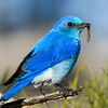 "Mountain Bluebird with worm © 2016 Nova Mackentley Rocky Mtn NP, CO MTN  <div class=""ss-paypal-button""><div class=""ss-paypal-add-to-cart-section""><div class=""ss-paypal-product-options""><h4>Mat Sizes</h4><ul><li><a href=""https://www.paypal.com/cgi-bin/webscr?cmd=_cart&business=T77V5VKCW4K2U&lc=US&item_name=Mountain%20Bluebird%20with%20worm%20%C2%A9%202016%20Nova%20Mackentley%20Rocky%20Mtn%20NP%2C%20CO%20MTN&item_number=http%3A%2F%2Fwww.nightflightimages.com%2FGalleries-1%2FTravels%2Fi-d4xKtxX&button_subtype=products&no_note=0&cn=Add%20special%20instructions%20to%20the%20seller%3A&no_shipping=2&currency_code=USD&weight_unit=lbs&add=1&bn=PP-ShopCartBF%3Abtn_cart_SM.gif%3ANonHosted&on0=Mat%20Sizes&option_select0=5%20x%207&option_amount0=10.00&option_select1=8%20x%2010&option_amount1=18.00&option_select2=11%20x%2014&option_amount2=28.00&option_select3=card&option_amount3=4.00&option_index=0&charset=utf-8&submit=&os0=5%20x%207"" target=""paypal""><span>5 x 7 $11.00 USD</span><img src=""https://www.paypalobjects.com/en_US/i/btn/btn_cart_SM.gif""></a></li><li><a href=""https://www.paypal.com/cgi-bin/webscr?cmd=_cart&business=T77V5VKCW4K2U&lc=US&item_name=Mountain%20Bluebird%20with%20worm%20%C2%A9%202016%20Nova%20Mackentley%20Rocky%20Mtn%20NP%2C%20CO%20MTN&item_number=http%3A%2F%2Fwww.nightflightimages.com%2FGalleries-1%2FTravels%2Fi-d4xKtxX&button_subtype=products&no_note=0&cn=Add%20special%20instructions%20to%20the%20seller%3A&no_shipping=2&currency_code=USD&weight_unit=lbs&add=1&bn=PP-ShopCartBF%3Abtn_cart_SM.gif%3ANonHosted&on0=Mat%20Sizes&option_select0=5%20x%207&option_amount0=10.00&option_select1=8%20x%2010&option_amount1=18.00&option_select2=11%20x%2014&option_amount2=28.00&option_select3=card&option_amount3=4.00&option_index=0&charset=utf-8&submit=&os0=8%20x%2010"" target=""paypal""><span>8 x 10 $19.00 USD</span><img src=""https://www.paypalobjects.com/en_US/i/btn/btn_cart_SM.gif""></a></li><li><a href=""https://www.paypal.com/cgi-bin/webscr?cmd=_cart&business=T77V5VKCW4K2U&lc=US&item_name=Mountain%20Bluebird%20with%20worm%20%C2%A9%202016%20Nova%20Mackentley%20Rocky%20Mtn%20NP%2C%20CO%20MTN&item_number=http%3A%2F%2Fwww.nightflightimages.com%2FGalleries-1%2FTravels%2Fi-d4xKtxX&button_subtype=products&no_note=0&cn=Add%20special%20instructions%20to%20the%20seller%3A&no_shipping=2&currency_code=USD&weight_unit=lbs&add=1&bn=PP-ShopCartBF%3Abtn_cart_SM.gif%3ANonHosted&on0=Mat%20Sizes&option_select0=5%20x%207&option_amount0=10.00&option_select1=8%20x%2010&option_amount1=18.00&option_select2=11%20x%2014&option_amount2=28.00&option_select3=card&option_amount3=4.00&option_index=0&charset=utf-8&submit=&os0=11%20x%2014"" target=""paypal""><span>11 x 14 $29.00 USD</span><img src=""https://www.paypalobjects.com/en_US/i/btn/btn_cart_SM.gif""></a></li><li><a href=""https://www.paypal.com/cgi-bin/webscr?cmd=_cart&business=T77V5VKCW4K2U&lc=US&item_name=Mountain%20Bluebird%20with%20worm%20%C2%A9%202016%20Nova%20Mackentley%20Rocky%20Mtn%20NP%2C%20CO%20MTN&item_number=http%3A%2F%2Fwww.nightflightimages.com%2FGalleries-1%2FTravels%2Fi-d4xKtxX&button_subtype=products&no_note=0&cn=Add%20special%20instructions%20to%20the%20seller%3A&no_shipping=2&currency_code=USD&weight_unit=lbs&add=1&bn=PP-ShopCartBF%3Abtn_cart_SM.gif%3ANonHosted&on0=Mat%20Sizes&option_select0=5%20x%207&option_amount0=10.00&option_select1=8%20x%2010&option_amount1=18.00&option_select2=11%20x%2014&option_amount2=28.00&option_select3=card&option_amount3=4.00&option_index=0&charset=utf-8&submit=&os0=card"" target=""paypal""><span>card $5.00 USD</span><img src=""https://www.paypalobjects.com/en_US/i/btn/btn_cart_SM.gif""></a></li></ul></div></div> <div class=""ss-paypal-view-cart-section""><a href=""https://www.paypal.com/cgi-bin/webscr?cmd=_cart&business=T77V5VKCW4K2U&display=1&item_name=Mountain%20Bluebird%20with%20worm%20%C2%A9%202016%20Nova%20Mackentley%20Rocky%20Mtn%20NP%2C%20CO%20MTN&item_number=http%3A%2F%2Fwww.nightflightimages.com%2FGalleries-1%2FTravels%2Fi-d4xKtxX&charset=utf-8&submit="" target=""paypal"" class=""ss-paypal-submit-button""><img src=""https://www.paypalobjects.com/en_US/i/btn/btn_viewcart_LG.gif""></a></div></div><div class=""ss-paypal-button-end""></div>"