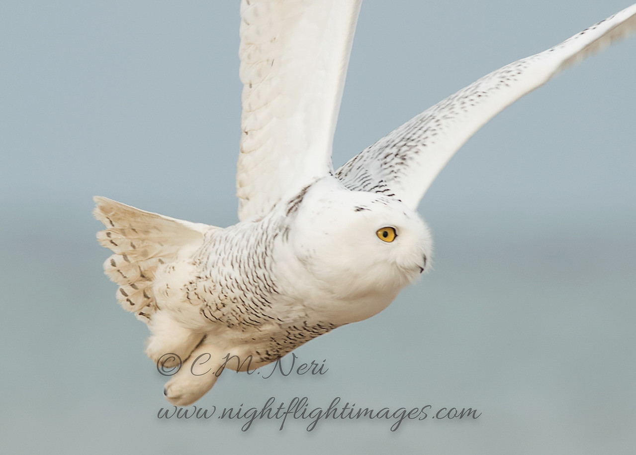 """Snowy Owl © 2017 Chris M Neri Whitefish Point, MI SN17cp  <div class=""""ss-paypal-button""""><div class=""""ss-paypal-add-to-cart-section""""><div class=""""ss-paypal-product-options""""><h4>Mat Sizes</h4><ul><li><a href=""""https://www.paypal.com/cgi-bin/webscr?cmd=_cart&business=T77V5VKCW4K2U&lc=US&item_name=Snowy%20Owl%20%C2%A9%202017%20Chris%20M%20Neri%20Whitefish%20Point%2C%20MI%20SN17cp&item_number=http%3A%2F%2Fwww.nightflightimages.com%2FGalleries-1%2FNew%2Fi-fLCjH2r&button_subtype=products&no_note=0&cn=Add%20special%20instructions%20to%20the%20seller%3A&no_shipping=2&currency_code=USD&weight_unit=lbs&add=1&bn=PP-ShopCartBF%3Abtn_cart_SM.gif%3ANonHosted&on0=Mat%20Sizes&option_select0=5%20x%207&option_amount0=12.00&option_select1=8%20x%2010&option_amount1=19.00&option_select2=11%20x%2014&option_amount2=29.00&option_select3=card&option_amount3=5.00&option_index=0&charset=utf-8&submit=&os0=5%20x%207"""" target=""""paypal""""><span>5 x 7 $12.00 USD</span><img src=""""https://www.paypalobjects.com/en_US/i/btn/btn_cart_SM.gif""""></a></li><li><a href=""""https://www.paypal.com/cgi-bin/webscr?cmd=_cart&business=T77V5VKCW4K2U&lc=US&item_name=Snowy%20Owl%20%C2%A9%202017%20Chris%20M%20Neri%20Whitefish%20Point%2C%20MI%20SN17cp&item_number=http%3A%2F%2Fwww.nightflightimages.com%2FGalleries-1%2FNew%2Fi-fLCjH2r&button_subtype=products&no_note=0&cn=Add%20special%20instructions%20to%20the%20seller%3A&no_shipping=2&currency_code=USD&weight_unit=lbs&add=1&bn=PP-ShopCartBF%3Abtn_cart_SM.gif%3ANonHosted&on0=Mat%20Sizes&option_select0=5%20x%207&option_amount0=12.00&option_select1=8%20x%2010&option_amount1=19.00&option_select2=11%20x%2014&option_amount2=29.00&option_select3=card&option_amount3=5.00&option_index=0&charset=utf-8&submit=&os0=8%20x%2010"""" target=""""paypal""""><span>8 x 10 $19.00 USD</span><img src=""""https://www.paypalobjects.com/en_US/i/btn/btn_cart_SM.gif""""></a></li><li><a href=""""https://www.paypal.com/cgi-bin/webscr?cmd=_cart&business=T77V5VKCW4K2U&lc=US&item_name=Snowy%20Owl%20%C2%A9%202017%20Chris%20M%20Neri%2"""