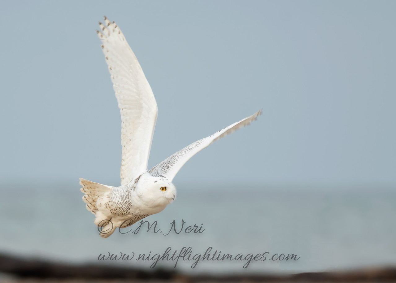 """Snowy Owl © 2017 Chris M Neri Whitefish Point, MI SN17  <div class=""""ss-paypal-button""""><div class=""""ss-paypal-add-to-cart-section""""><div class=""""ss-paypal-product-options""""><h4>Mat Sizes</h4><ul><li><a href=""""https://www.paypal.com/cgi-bin/webscr?cmd=_cart&business=T77V5VKCW4K2U&lc=US&item_name=Snowy%20Owl%20%C2%A9%202017%20Chris%20M%20Neri%20Whitefish%20Point%2C%20MI%20SN17&item_number=http%3A%2F%2Fwww.nightflightimages.com%2FGalleries-1%2FNew%2Fi-fTndw8S&button_subtype=products&no_note=0&cn=Add%20special%20instructions%20to%20the%20seller%3A&no_shipping=2&currency_code=USD&weight_unit=lbs&add=1&bn=PP-ShopCartBF%3Abtn_cart_SM.gif%3ANonHosted&on0=Mat%20Sizes&option_select0=5%20x%207&option_amount0=12.00&option_select1=8%20x%2010&option_amount1=19.00&option_select2=11%20x%2014&option_amount2=29.00&option_select3=card&option_amount3=5.00&option_index=0&charset=utf-8&submit=&os0=5%20x%207"""" target=""""paypal""""><span>5 x 7 $12.00 USD</span><img src=""""https://www.paypalobjects.com/en_US/i/btn/btn_cart_SM.gif""""></a></li><li><a href=""""https://www.paypal.com/cgi-bin/webscr?cmd=_cart&business=T77V5VKCW4K2U&lc=US&item_name=Snowy%20Owl%20%C2%A9%202017%20Chris%20M%20Neri%20Whitefish%20Point%2C%20MI%20SN17&item_number=http%3A%2F%2Fwww.nightflightimages.com%2FGalleries-1%2FNew%2Fi-fTndw8S&button_subtype=products&no_note=0&cn=Add%20special%20instructions%20to%20the%20seller%3A&no_shipping=2&currency_code=USD&weight_unit=lbs&add=1&bn=PP-ShopCartBF%3Abtn_cart_SM.gif%3ANonHosted&on0=Mat%20Sizes&option_select0=5%20x%207&option_amount0=12.00&option_select1=8%20x%2010&option_amount1=19.00&option_select2=11%20x%2014&option_amount2=29.00&option_select3=card&option_amount3=5.00&option_index=0&charset=utf-8&submit=&os0=8%20x%2010"""" target=""""paypal""""><span>8 x 10 $19.00 USD</span><img src=""""https://www.paypalobjects.com/en_US/i/btn/btn_cart_SM.gif""""></a></li><li><a href=""""https://www.paypal.com/cgi-bin/webscr?cmd=_cart&business=T77V5VKCW4K2U&lc=US&item_name=Snowy%20Owl%20%C2%A9%202017%20Chris%20M%20Neri%20White"""
