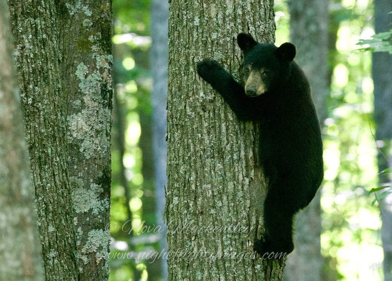 """Bear cub © 2015 Nova Mackentley, Somewhere in WI.  BCD  <div class=""""ss-paypal-button""""><div class=""""ss-paypal-add-to-cart-section""""><div class=""""ss-paypal-product-options""""><h4>Mat Sizes</h4><ul><li><a href=""""https://www.paypal.com/cgi-bin/webscr?cmd=_cart&business=T77V5VKCW4K2U&lc=US&item_name=Bear%20cub%20%C2%A9%202015%20Nova%20Mackentley%2C%20Somewhere%20in%20WI.%20%20BCD&item_number=http%3A%2F%2Fwww.nightflightimages.com%2FGalleries-1%2FMammals%2Fi-t5ZXW46&button_subtype=products&no_note=0&cn=Add%20special%20instructions%20to%20the%20seller%3A&no_shipping=2&currency_code=USD&weight_unit=lbs&add=1&bn=PP-ShopCartBF%3Abtn_cart_SM.gif%3ANonHosted&on0=Mat%20Sizes&option_select0=5%20x%207&option_amount0=10.00&option_select1=8%20x%2010&option_amount1=18.00&option_select2=11%20x%2014&option_amount2=28.00&option_select3=card&option_amount3=4.00&option_index=0&charset=utf-8&submit=&os0=5%20x%207"""" target=""""paypal""""><span>5 x 7 $11.00 USD</span><img src=""""https://www.paypalobjects.com/en_US/i/btn/btn_cart_SM.gif""""></a></li><li><a href=""""https://www.paypal.com/cgi-bin/webscr?cmd=_cart&business=T77V5VKCW4K2U&lc=US&item_name=Bear%20cub%20%C2%A9%202015%20Nova%20Mackentley%2C%20Somewhere%20in%20WI.%20%20BCD&item_number=http%3A%2F%2Fwww.nightflightimages.com%2FGalleries-1%2FMammals%2Fi-t5ZXW46&button_subtype=products&no_note=0&cn=Add%20special%20instructions%20to%20the%20seller%3A&no_shipping=2&currency_code=USD&weight_unit=lbs&add=1&bn=PP-ShopCartBF%3Abtn_cart_SM.gif%3ANonHosted&on0=Mat%20Sizes&option_select0=5%20x%207&option_amount0=10.00&option_select1=8%20x%2010&option_amount1=18.00&option_select2=11%20x%2014&option_amount2=28.00&option_select3=card&option_amount3=4.00&option_index=0&charset=utf-8&submit=&os0=8%20x%2010"""" target=""""paypal""""><span>8 x 10 $19.00 USD</span><img src=""""https://www.paypalobjects.com/en_US/i/btn/btn_cart_SM.gif""""></a></li><li><a href=""""https://www.paypal.com/cgi-bin/webscr?cmd=_cart&business=T77V5VKCW4K2U&lc=US&item_name=Bear%20cub%20%C2%A9%202015%20Nova%20Mackentley"""