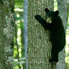 "Bear cub © 2015 Nova Mackentley, Somewhere in WI.  BCD  <div class=""ss-paypal-button""><div class=""ss-paypal-add-to-cart-section""><div class=""ss-paypal-product-options""><h4>Mat Sizes</h4><ul><li><a href=""https://www.paypal.com/cgi-bin/webscr?cmd=_cart&business=T77V5VKCW4K2U&lc=US&item_name=Bear%20cub%20%C2%A9%202015%20Nova%20Mackentley%2C%20Somewhere%20in%20WI.%20%20BCD&item_number=http%3A%2F%2Fwww.nightflightimages.com%2FGalleries-1%2FMammals%2Fi-t5ZXW46&button_subtype=products&no_note=0&cn=Add%20special%20instructions%20to%20the%20seller%3A&no_shipping=2&currency_code=USD&weight_unit=lbs&add=1&bn=PP-ShopCartBF%3Abtn_cart_SM.gif%3ANonHosted&on0=Mat%20Sizes&option_select0=5%20x%207&option_amount0=10.00&option_select1=8%20x%2010&option_amount1=18.00&option_select2=11%20x%2014&option_amount2=28.00&option_select3=card&option_amount3=4.00&option_index=0&charset=utf-8&submit=&os0=5%20x%207"" target=""paypal""><span>5 x 7 $11.00 USD</span><img src=""https://www.paypalobjects.com/en_US/i/btn/btn_cart_SM.gif""></a></li><li><a href=""https://www.paypal.com/cgi-bin/webscr?cmd=_cart&business=T77V5VKCW4K2U&lc=US&item_name=Bear%20cub%20%C2%A9%202015%20Nova%20Mackentley%2C%20Somewhere%20in%20WI.%20%20BCD&item_number=http%3A%2F%2Fwww.nightflightimages.com%2FGalleries-1%2FMammals%2Fi-t5ZXW46&button_subtype=products&no_note=0&cn=Add%20special%20instructions%20to%20the%20seller%3A&no_shipping=2&currency_code=USD&weight_unit=lbs&add=1&bn=PP-ShopCartBF%3Abtn_cart_SM.gif%3ANonHosted&on0=Mat%20Sizes&option_select0=5%20x%207&option_amount0=10.00&option_select1=8%20x%2010&option_amount1=18.00&option_select2=11%20x%2014&option_amount2=28.00&option_select3=card&option_amount3=4.00&option_index=0&charset=utf-8&submit=&os0=8%20x%2010"" target=""paypal""><span>8 x 10 $19.00 USD</span><img src=""https://www.paypalobjects.com/en_US/i/btn/btn_cart_SM.gif""></a></li><li><a href=""https://www.paypal.com/cgi-bin/webscr?cmd=_cart&business=T77V5VKCW4K2U&lc=US&item_name=Bear%20cub%20%C2%A9%202015%20Nova%20Mackentley%2C%20Somewhere%20in%20WI.%20%20BCD&item_number=http%3A%2F%2Fwww.nightflightimages.com%2FGalleries-1%2FMammals%2Fi-t5ZXW46&button_subtype=products&no_note=0&cn=Add%20special%20instructions%20to%20the%20seller%3A&no_shipping=2&currency_code=USD&weight_unit=lbs&add=1&bn=PP-ShopCartBF%3Abtn_cart_SM.gif%3ANonHosted&on0=Mat%20Sizes&option_select0=5%20x%207&option_amount0=10.00&option_select1=8%20x%2010&option_amount1=18.00&option_select2=11%20x%2014&option_amount2=28.00&option_select3=card&option_amount3=4.00&option_index=0&charset=utf-8&submit=&os0=11%20x%2014"" target=""paypal""><span>11 x 14 $29.00 USD</span><img src=""https://www.paypalobjects.com/en_US/i/btn/btn_cart_SM.gif""></a></li><li><a href=""https://www.paypal.com/cgi-bin/webscr?cmd=_cart&business=T77V5VKCW4K2U&lc=US&item_name=Bear%20cub%20%C2%A9%202015%20Nova%20Mackentley%2C%20Somewhere%20in%20WI.%20%20BCD&item_number=http%3A%2F%2Fwww.nightflightimages.com%2FGalleries-1%2FMammals%2Fi-t5ZXW46&button_subtype=products&no_note=0&cn=Add%20special%20instructions%20to%20the%20seller%3A&no_shipping=2&currency_code=USD&weight_unit=lbs&add=1&bn=PP-ShopCartBF%3Abtn_cart_SM.gif%3ANonHosted&on0=Mat%20Sizes&option_select0=5%20x%207&option_amount0=10.00&option_select1=8%20x%2010&option_amount1=18.00&option_select2=11%20x%2014&option_amount2=28.00&option_select3=card&option_amount3=4.00&option_index=0&charset=utf-8&submit=&os0=card"" target=""paypal""><span>card $5.00 USD</span><img src=""https://www.paypalobjects.com/en_US/i/btn/btn_cart_SM.gif""></a></li></ul></div></div> <div class=""ss-paypal-view-cart-section""><a href=""https://www.paypal.com/cgi-bin/webscr?cmd=_cart&business=T77V5VKCW4K2U&display=1&item_name=Bear%20cub%20%C2%A9%202015%20Nova%20Mackentley%2C%20Somewhere%20in%20WI.%20%20BCD&item_number=http%3A%2F%2Fwww.nightflightimages.com%2FGalleries-1%2FMammals%2Fi-t5ZXW46&charset=utf-8&submit="" target=""paypal"" class=""ss-paypal-submit-button""><img src=""https://www.paypalobjects.com/en_US/i/btn/btn_viewcart_LG.gif""></a></div></div><div class=""ss-paypal-button-end""></div>"