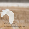"Snowy Owl © 2017 Chris M Neri Chippewa County, MI SNPng  <div class=""ss-paypal-button""><div class=""ss-paypal-add-to-cart-section""><div class=""ss-paypal-product-options""><h4>Mat Sizes</h4><ul><li><a href=""https://www.paypal.com/cgi-bin/webscr?cmd=_cart&business=T77V5VKCW4K2U&lc=US&item_name=Snowy%20Owl%20%C2%A9%202017%20Chris%20M%20Neri%20Chippewa%20County%2C%20MI%20SNPng&item_number=http%3A%2F%2Fwww.nightflightimages.com%2FGalleries-1%2FNew%2Fi-tdsdHBG&button_subtype=products&no_note=0&cn=Add%20special%20instructions%20to%20the%20seller%3A&no_shipping=2&currency_code=USD&weight_unit=lbs&add=1&bn=PP-ShopCartBF%3Abtn_cart_SM.gif%3ANonHosted&on0=Mat%20Sizes&option_select0=5%20x%207&option_amount0=12.00&option_select1=8%20x%2010&option_amount1=19.00&option_select2=11%20x%2014&option_amount2=29.00&option_select3=card&option_amount3=5.00&option_index=0&charset=utf-8&submit=&os0=5%20x%207"" target=""paypal""><span>5 x 7 $12.00 USD</span><img src=""https://www.paypalobjects.com/en_US/i/btn/btn_cart_SM.gif""></a></li><li><a href=""https://www.paypal.com/cgi-bin/webscr?cmd=_cart&business=T77V5VKCW4K2U&lc=US&item_name=Snowy%20Owl%20%C2%A9%202017%20Chris%20M%20Neri%20Chippewa%20County%2C%20MI%20SNPng&item_number=http%3A%2F%2Fwww.nightflightimages.com%2FGalleries-1%2FNew%2Fi-tdsdHBG&button_subtype=products&no_note=0&cn=Add%20special%20instructions%20to%20the%20seller%3A&no_shipping=2&currency_code=USD&weight_unit=lbs&add=1&bn=PP-ShopCartBF%3Abtn_cart_SM.gif%3ANonHosted&on0=Mat%20Sizes&option_select0=5%20x%207&option_amount0=12.00&option_select1=8%20x%2010&option_amount1=19.00&option_select2=11%20x%2014&option_amount2=29.00&option_select3=card&option_amount3=5.00&option_index=0&charset=utf-8&submit=&os0=8%20x%2010"" target=""paypal""><span>8 x 10 $19.00 USD</span><img src=""https://www.paypalobjects.com/en_US/i/btn/btn_cart_SM.gif""></a></li><li><a href=""https://www.paypal.com/cgi-bin/webscr?cmd=_cart&business=T77V5VKCW4K2U&lc=US&item_name=Snowy%20Owl%20%C2%A9%202017%20Chris%20M%20Neri%20Chippewa%20County%2C%20MI%20SNPng&item_number=http%3A%2F%2Fwww.nightflightimages.com%2FGalleries-1%2FNew%2Fi-tdsdHBG&button_subtype=products&no_note=0&cn=Add%20special%20instructions%20to%20the%20seller%3A&no_shipping=2&currency_code=USD&weight_unit=lbs&add=1&bn=PP-ShopCartBF%3Abtn_cart_SM.gif%3ANonHosted&on0=Mat%20Sizes&option_select0=5%20x%207&option_amount0=12.00&option_select1=8%20x%2010&option_amount1=19.00&option_select2=11%20x%2014&option_amount2=29.00&option_select3=card&option_amount3=5.00&option_index=0&charset=utf-8&submit=&os0=11%20x%2014"" target=""paypal""><span>11 x 14 $29.00 USD</span><img src=""https://www.paypalobjects.com/en_US/i/btn/btn_cart_SM.gif""></a></li><li><a href=""https://www.paypal.com/cgi-bin/webscr?cmd=_cart&business=T77V5VKCW4K2U&lc=US&item_name=Snowy%20Owl%20%C2%A9%202017%20Chris%20M%20Neri%20Chippewa%20County%2C%20MI%20SNPng&item_number=http%3A%2F%2Fwww.nightflightimages.com%2FGalleries-1%2FNew%2Fi-tdsdHBG&button_subtype=products&no_note=0&cn=Add%20special%20instructions%20to%20the%20seller%3A&no_shipping=2&currency_code=USD&weight_unit=lbs&add=1&bn=PP-ShopCartBF%3Abtn_cart_SM.gif%3ANonHosted&on0=Mat%20Sizes&option_select0=5%20x%207&option_amount0=12.00&option_select1=8%20x%2010&option_amount1=19.00&option_select2=11%20x%2014&option_amount2=29.00&option_select3=card&option_amount3=5.00&option_index=0&charset=utf-8&submit=&os0=card"" target=""paypal""><span>card $5.00 USD</span><img src=""https://www.paypalobjects.com/en_US/i/btn/btn_cart_SM.gif""></a></li></ul></div></div> <div class=""ss-paypal-view-cart-section""><a href=""https://www.paypal.com/cgi-bin/webscr?cmd=_cart&business=T77V5VKCW4K2U&display=1&item_name=Snowy%20Owl%20%C2%A9%202017%20Chris%20M%20Neri%20Chippewa%20County%2C%20MI%20SNPng&item_number=http%3A%2F%2Fwww.nightflightimages.com%2FGalleries-1%2FNew%2Fi-tdsdHBG&charset=utf-8&submit="" target=""paypal"" class=""ss-paypal-submit-button""><img src=""https://www.paypalobjects.com/en_US/i/btn/btn_viewcart_LG.gif""></a></div></div><div class=""ss-paypal-button-end""></div>"