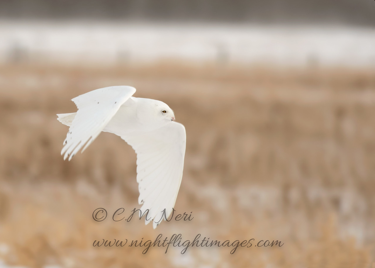 """Snowy Owl © 2017 Chris M Neri Chippewa County, MI SNPng  <div class=""""ss-paypal-button""""><div class=""""ss-paypal-add-to-cart-section""""><div class=""""ss-paypal-product-options""""><h4>Mat Sizes</h4><ul><li><a href=""""https://www.paypal.com/cgi-bin/webscr?cmd=_cart&business=T77V5VKCW4K2U&lc=US&item_name=Snowy%20Owl%20%C2%A9%202017%20Chris%20M%20Neri%20Chippewa%20County%2C%20MI%20SNPng&item_number=http%3A%2F%2Fwww.nightflightimages.com%2FGalleries-1%2FNew%2Fi-tdsdHBG&button_subtype=products&no_note=0&cn=Add%20special%20instructions%20to%20the%20seller%3A&no_shipping=2&currency_code=USD&weight_unit=lbs&add=1&bn=PP-ShopCartBF%3Abtn_cart_SM.gif%3ANonHosted&on0=Mat%20Sizes&option_select0=5%20x%207&option_amount0=12.00&option_select1=8%20x%2010&option_amount1=19.00&option_select2=11%20x%2014&option_amount2=29.00&option_select3=card&option_amount3=5.00&option_index=0&charset=utf-8&submit=&os0=5%20x%207"""" target=""""paypal""""><span>5 x 7 $12.00 USD</span><img src=""""https://www.paypalobjects.com/en_US/i/btn/btn_cart_SM.gif""""></a></li><li><a href=""""https://www.paypal.com/cgi-bin/webscr?cmd=_cart&business=T77V5VKCW4K2U&lc=US&item_name=Snowy%20Owl%20%C2%A9%202017%20Chris%20M%20Neri%20Chippewa%20County%2C%20MI%20SNPng&item_number=http%3A%2F%2Fwww.nightflightimages.com%2FGalleries-1%2FNew%2Fi-tdsdHBG&button_subtype=products&no_note=0&cn=Add%20special%20instructions%20to%20the%20seller%3A&no_shipping=2&currency_code=USD&weight_unit=lbs&add=1&bn=PP-ShopCartBF%3Abtn_cart_SM.gif%3ANonHosted&on0=Mat%20Sizes&option_select0=5%20x%207&option_amount0=12.00&option_select1=8%20x%2010&option_amount1=19.00&option_select2=11%20x%2014&option_amount2=29.00&option_select3=card&option_amount3=5.00&option_index=0&charset=utf-8&submit=&os0=8%20x%2010"""" target=""""paypal""""><span>8 x 10 $19.00 USD</span><img src=""""https://www.paypalobjects.com/en_US/i/btn/btn_cart_SM.gif""""></a></li><li><a href=""""https://www.paypal.com/cgi-bin/webscr?cmd=_cart&business=T77V5VKCW4K2U&lc=US&item_name=Snowy%20Owl%20%C2%A9%202017%20Chris%20M%20Neri%20Ch"""