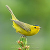 "Wilson's Warbler © 2016 Nova Mackentley Rocky Mtn NP, CO WWU  <div class=""ss-paypal-button""><div class=""ss-paypal-add-to-cart-section""><div class=""ss-paypal-product-options""><h4>Mat Sizes</h4><ul><li><a href=""https://www.paypal.com/cgi-bin/webscr?cmd=_cart&business=T77V5VKCW4K2U&lc=US&item_name=Wilson's%20Warbler%20%C2%A9%202016%20Nova%20Mackentley%20Rocky%20Mtn%20NP%2C%20CO%20WWU&item_number=http%3A%2F%2Fwww.nightflightimages.com%2FGalleries-1%2FWarbler%2Fi-wdGSD4v&button_subtype=products&no_note=0&cn=Add%20special%20instructions%20to%20the%20seller%3A&no_shipping=2&currency_code=USD&weight_unit=lbs&add=1&bn=PP-ShopCartBF%3Abtn_cart_SM.gif%3ANonHosted&on0=Mat%20Sizes&option_select0=5%20x%207&option_amount0=10.00&option_select1=8%20x%2010&option_amount1=18.00&option_select2=11%20x%2014&option_amount2=28.00&option_select3=card&option_amount3=4.00&option_index=0&charset=utf-8&submit=&os0=5%20x%207"" target=""paypal""><span>5 x 7 $11.00 USD</span><img src=""https://www.paypalobjects.com/en_US/i/btn/btn_cart_SM.gif""></a></li><li><a href=""https://www.paypal.com/cgi-bin/webscr?cmd=_cart&business=T77V5VKCW4K2U&lc=US&item_name=Wilson's%20Warbler%20%C2%A9%202016%20Nova%20Mackentley%20Rocky%20Mtn%20NP%2C%20CO%20WWU&item_number=http%3A%2F%2Fwww.nightflightimages.com%2FGalleries-1%2FWarbler%2Fi-wdGSD4v&button_subtype=products&no_note=0&cn=Add%20special%20instructions%20to%20the%20seller%3A&no_shipping=2&currency_code=USD&weight_unit=lbs&add=1&bn=PP-ShopCartBF%3Abtn_cart_SM.gif%3ANonHosted&on0=Mat%20Sizes&option_select0=5%20x%207&option_amount0=10.00&option_select1=8%20x%2010&option_amount1=18.00&option_select2=11%20x%2014&option_amount2=28.00&option_select3=card&option_amount3=4.00&option_index=0&charset=utf-8&submit=&os0=8%20x%2010"" target=""paypal""><span>8 x 10 $19.00 USD</span><img src=""https://www.paypalobjects.com/en_US/i/btn/btn_cart_SM.gif""></a></li><li><a href=""https://www.paypal.com/cgi-bin/webscr?cmd=_cart&business=T77V5VKCW4K2U&lc=US&item_name=Wilson's%20Warbler%20%C2%A9%202016%20Nova%20Mackentley%20Rocky%20Mtn%20NP%2C%20CO%20WWU&item_number=http%3A%2F%2Fwww.nightflightimages.com%2FGalleries-1%2FWarbler%2Fi-wdGSD4v&button_subtype=products&no_note=0&cn=Add%20special%20instructions%20to%20the%20seller%3A&no_shipping=2&currency_code=USD&weight_unit=lbs&add=1&bn=PP-ShopCartBF%3Abtn_cart_SM.gif%3ANonHosted&on0=Mat%20Sizes&option_select0=5%20x%207&option_amount0=10.00&option_select1=8%20x%2010&option_amount1=18.00&option_select2=11%20x%2014&option_amount2=28.00&option_select3=card&option_amount3=4.00&option_index=0&charset=utf-8&submit=&os0=11%20x%2014"" target=""paypal""><span>11 x 14 $29.00 USD</span><img src=""https://www.paypalobjects.com/en_US/i/btn/btn_cart_SM.gif""></a></li><li><a href=""https://www.paypal.com/cgi-bin/webscr?cmd=_cart&business=T77V5VKCW4K2U&lc=US&item_name=Wilson's%20Warbler%20%C2%A9%202016%20Nova%20Mackentley%20Rocky%20Mtn%20NP%2C%20CO%20WWU&item_number=http%3A%2F%2Fwww.nightflightimages.com%2FGalleries-1%2FWarbler%2Fi-wdGSD4v&button_subtype=products&no_note=0&cn=Add%20special%20instructions%20to%20the%20seller%3A&no_shipping=2&currency_code=USD&weight_unit=lbs&add=1&bn=PP-ShopCartBF%3Abtn_cart_SM.gif%3ANonHosted&on0=Mat%20Sizes&option_select0=5%20x%207&option_amount0=10.00&option_select1=8%20x%2010&option_amount1=18.00&option_select2=11%20x%2014&option_amount2=28.00&option_select3=card&option_amount3=4.00&option_index=0&charset=utf-8&submit=&os0=card"" target=""paypal""><span>card $5.00 USD</span><img src=""https://www.paypalobjects.com/en_US/i/btn/btn_cart_SM.gif""></a></li></ul></div></div> <div class=""ss-paypal-view-cart-section""><a href=""https://www.paypal.com/cgi-bin/webscr?cmd=_cart&business=T77V5VKCW4K2U&display=1&item_name=Wilson's%20Warbler%20%C2%A9%202016%20Nova%20Mackentley%20Rocky%20Mtn%20NP%2C%20CO%20WWU&item_number=http%3A%2F%2Fwww.nightflightimages.com%2FGalleries-1%2FWarbler%2Fi-wdGSD4v&charset=utf-8&submit="" target=""paypal"" class=""ss-paypal-submit-button""><img src=""https://www.paypalobjects.com/en_US/i/btn/btn_viewcart_LG.gif""></a></div></div><div class=""ss-paypal-button-end""></div>"
