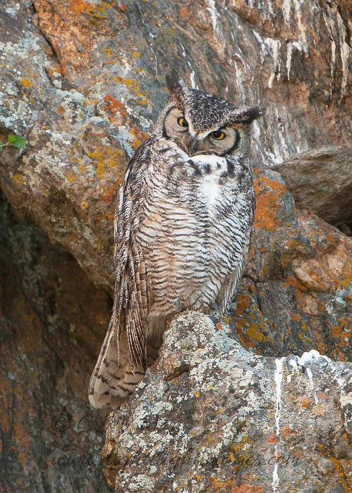 """Great Horned Owl © 2016 Chris M Neri Estes Park, CO GHEP  <div class=""""ss-paypal-button""""><div class=""""ss-paypal-add-to-cart-section""""><div class=""""ss-paypal-product-options""""><h4>Mat Sizes</h4><ul><li><a href=""""https://www.paypal.com/cgi-bin/webscr?cmd=_cart&business=T77V5VKCW4K2U&lc=US&item_name=Great%20Horned%20Owl%20%C2%A9%202016%20Chris%20M%20Neri%20Estes%20Park%2C%20CO%20GHEP&item_number=http%3A%2F%2Fwww.nightflightimages.com%2FGalleries-1%2FNew%2Fi-xZwqrgG&button_subtype=products&no_note=0&cn=Add%20special%20instructions%20to%20the%20seller%3A&no_shipping=2&currency_code=USD&weight_unit=lbs&add=1&bn=PP-ShopCartBF%3Abtn_cart_SM.gif%3ANonHosted&on0=Mat%20Sizes&option_select0=5%20x%207&option_amount0=12.00&option_select1=8%20x%2010&option_amount1=19.00&option_select2=11%20x%2014&option_amount2=29.00&option_select3=card&option_amount3=5.00&option_index=0&charset=utf-8&submit=&os0=5%20x%207"""" target=""""paypal""""><span>5 x 7 $12.00 USD</span><img src=""""https://www.paypalobjects.com/en_US/i/btn/btn_cart_SM.gif""""></a></li><li><a href=""""https://www.paypal.com/cgi-bin/webscr?cmd=_cart&business=T77V5VKCW4K2U&lc=US&item_name=Great%20Horned%20Owl%20%C2%A9%202016%20Chris%20M%20Neri%20Estes%20Park%2C%20CO%20GHEP&item_number=http%3A%2F%2Fwww.nightflightimages.com%2FGalleries-1%2FNew%2Fi-xZwqrgG&button_subtype=products&no_note=0&cn=Add%20special%20instructions%20to%20the%20seller%3A&no_shipping=2&currency_code=USD&weight_unit=lbs&add=1&bn=PP-ShopCartBF%3Abtn_cart_SM.gif%3ANonHosted&on0=Mat%20Sizes&option_select0=5%20x%207&option_amount0=12.00&option_select1=8%20x%2010&option_amount1=19.00&option_select2=11%20x%2014&option_amount2=29.00&option_select3=card&option_amount3=5.00&option_index=0&charset=utf-8&submit=&os0=8%20x%2010"""" target=""""paypal""""><span>8 x 10 $19.00 USD</span><img src=""""https://www.paypalobjects.com/en_US/i/btn/btn_cart_SM.gif""""></a></li><li><a href=""""https://www.paypal.com/cgi-bin/webscr?cmd=_cart&business=T77V5VKCW4K2U&lc=US&item_name=Great%20Horned%20Owl%20%C2%A9%202016%20Chris"""