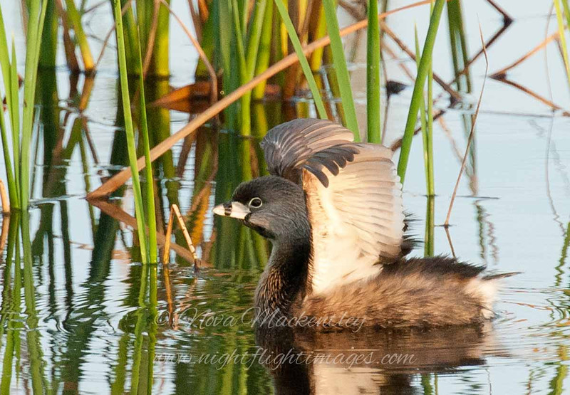 "Pied-billed Grebe © 2010 Nova Mackentley South Padre Island, TX PBG  <div class=""ss-paypal-button""><div class=""ss-paypal-add-to-cart-section""><div class=""ss-paypal-product-options""><h4>Mat Sizes</h4><ul><li><a href=""https://www.paypal.com/cgi-bin/webscr?cmd=_cart&business=T77V5VKCW4K2U&lc=US&item_name=Pied-billed%20Grebe%20%C2%A9%202010%20Nova%20Mackentley%20South%20Padre%20Island%2C%20TX%20PBG&item_number=http%3A%2F%2Fwww.nightflightimages.com%2FGalleries-1%2FOur-Favorites%2Fi-4WdFNcV&button_subtype=products&no_note=0&cn=Add%20special%20instructions%20to%20the%20seller%3A&no_shipping=2&currency_code=USD&weight_unit=lbs&add=1&bn=PP-ShopCartBF%3Abtn_cart_SM.gif%3ANonHosted&on0=Mat%20Sizes&option_select0=5%20x%207&option_amount0=10.00&option_select1=8%20x%2010&option_amount1=18.00&option_select2=11%20x%2014&option_amount2=28.00&option_select3=card&option_amount3=4.00&option_index=0&charset=utf-8&submit=&os0=5%20x%207"" target=""paypal""><span>5 x 7 $11.00 USD</span><img src=""https://www.paypalobjects.com/en_US/i/btn/btn_cart_SM.gif""></a></li><li><a href=""https://www.paypal.com/cgi-bin/webscr?cmd=_cart&business=T77V5VKCW4K2U&lc=US&item_name=Pied-billed%20Grebe%20%C2%A9%202010%20Nova%20Mackentley%20South%20Padre%20Island%2C%20TX%20PBG&item_number=http%3A%2F%2Fwww.nightflightimages.com%2FGalleries-1%2FOur-Favorites%2Fi-4WdFNcV&button_subtype=products&no_note=0&cn=Add%20special%20instructions%20to%20the%20seller%3A&no_shipping=2&currency_code=USD&weight_unit=lbs&add=1&bn=PP-ShopCartBF%3Abtn_cart_SM.gif%3ANonHosted&on0=Mat%20Sizes&option_select0=5%20x%207&option_amount0=10.00&option_select1=8%20x%2010&option_amount1=18.00&option_select2=11%20x%2014&option_amount2=28.00&option_select3=card&option_amount3=4.00&option_index=0&charset=utf-8&submit=&os0=8%20x%2010"" target=""paypal""><span>8 x 10 $19.00 USD</span><img src=""https://www.paypalobjects.com/en_US/i/btn/btn_cart_SM.gif""></a></li><li><a href=""https://www.paypal.com/cgi-bin/webscr?cmd=_cart&business=T77V5VKCW4K2U&lc=US&item_name=Pied-billed%20Grebe%20%C2%A9%202010%20Nova%20Mackentley%20South%20Padre%20Island%2C%20TX%20PBG&item_number=http%3A%2F%2Fwww.nightflightimages.com%2FGalleries-1%2FOur-Favorites%2Fi-4WdFNcV&button_subtype=products&no_note=0&cn=Add%20special%20instructions%20to%20the%20seller%3A&no_shipping=2&currency_code=USD&weight_unit=lbs&add=1&bn=PP-ShopCartBF%3Abtn_cart_SM.gif%3ANonHosted&on0=Mat%20Sizes&option_select0=5%20x%207&option_amount0=10.00&option_select1=8%20x%2010&option_amount1=18.00&option_select2=11%20x%2014&option_amount2=28.00&option_select3=card&option_amount3=4.00&option_index=0&charset=utf-8&submit=&os0=11%20x%2014"" target=""paypal""><span>11 x 14 $29.00 USD</span><img src=""https://www.paypalobjects.com/en_US/i/btn/btn_cart_SM.gif""></a></li><li><a href=""https://www.paypal.com/cgi-bin/webscr?cmd=_cart&business=T77V5VKCW4K2U&lc=US&item_name=Pied-billed%20Grebe%20%C2%A9%202010%20Nova%20Mackentley%20South%20Padre%20Island%2C%20TX%20PBG&item_number=http%3A%2F%2Fwww.nightflightimages.com%2FGalleries-1%2FOur-Favorites%2Fi-4WdFNcV&button_subtype=products&no_note=0&cn=Add%20special%20instructions%20to%20the%20seller%3A&no_shipping=2&currency_code=USD&weight_unit=lbs&add=1&bn=PP-ShopCartBF%3Abtn_cart_SM.gif%3ANonHosted&on0=Mat%20Sizes&option_select0=5%20x%207&option_amount0=10.00&option_select1=8%20x%2010&option_amount1=18.00&option_select2=11%20x%2014&option_amount2=28.00&option_select3=card&option_amount3=4.00&option_index=0&charset=utf-8&submit=&os0=card"" target=""paypal""><span>card $5.00 USD</span><img src=""https://www.paypalobjects.com/en_US/i/btn/btn_cart_SM.gif""></a></li></ul></div></div> <div class=""ss-paypal-view-cart-section""><a href=""https://www.paypal.com/cgi-bin/webscr?cmd=_cart&business=T77V5VKCW4K2U&display=1&item_name=Pied-billed%20Grebe%20%C2%A9%202010%20Nova%20Mackentley%20South%20Padre%20Island%2C%20TX%20PBG&item_number=http%3A%2F%2Fwww.nightflightimages.com%2FGalleries-1%2FOur-Favorites%2Fi-4WdFNcV&charset=utf-8&submit="" target=""paypal"" class=""ss-paypal-submit-button""><img src=""https://www.paypalobjects.com/en_US/i/btn/btn_viewcart_LG.gif""></a></div></div><div class=""ss-paypal-button-end""></div>"