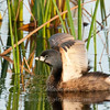 "Pied-billed Grebe © 2010 Nova Mackentley South Padre Island, TX PBG  <div class=""ss-paypal-button""><div class=""ss-paypal-add-to-cart-section""><div class=""ss-paypal-product-options""><h4>Mat Sizes</h4><ul><li><a href=""https://www.paypal.com/cgi-bin/webscr?cmd=_cart&amp;business=T77V5VKCW4K2U&amp;lc=US&amp;item_name=Pied-billed%20Grebe%20%C2%A9%202010%20Nova%20Mackentley%20South%20Padre%20Island%2C%20TX%20PBG&amp;item_number=http%3A%2F%2Fwww.nightflightimages.com%2FGalleries-1%2FOur-Favorites%2Fi-4WdFNcV&amp;button_subtype=products&amp;no_note=0&amp;cn=Add%20special%20instructions%20to%20the%20seller%3A&amp;no_shipping=2&amp;currency_code=USD&amp;weight_unit=lbs&amp;add=1&amp;bn=PP-ShopCartBF%3Abtn_cart_SM.gif%3ANonHosted&amp;on0=Mat%20Sizes&amp;option_select0=5%20x%207&amp;option_amount0=10.00&amp;option_select1=8%20x%2010&amp;option_amount1=18.00&amp;option_select2=11%20x%2014&amp;option_amount2=28.00&amp;option_select3=card&amp;option_amount3=4.00&amp;option_index=0&amp;charset=utf-8&amp;submit=&amp;os0=5%20x%207"" target=""paypal""><span>5 x 7 $11.00 USD</span><img src=""https://www.paypalobjects.com/en_US/i/btn/btn_cart_SM.gif""></a></li><li><a href=""https://www.paypal.com/cgi-bin/webscr?cmd=_cart&amp;business=T77V5VKCW4K2U&amp;lc=US&amp;item_name=Pied-billed%20Grebe%20%C2%A9%202010%20Nova%20Mackentley%20South%20Padre%20Island%2C%20TX%20PBG&amp;item_number=http%3A%2F%2Fwww.nightflightimages.com%2FGalleries-1%2FOur-Favorites%2Fi-4WdFNcV&amp;button_subtype=products&amp;no_note=0&amp;cn=Add%20special%20instructions%20to%20the%20seller%3A&amp;no_shipping=2&amp;currency_code=USD&amp;weight_unit=lbs&amp;add=1&amp;bn=PP-ShopCartBF%3Abtn_cart_SM.gif%3ANonHosted&amp;on0=Mat%20Sizes&amp;option_select0=5%20x%207&amp;option_amount0=10.00&amp;option_select1=8%20x%2010&amp;option_amount1=18.00&amp;option_select2=11%20x%2014&amp;option_amount2=28.00&amp;option_select3=card&amp;option_amount3=4.00&amp;option_index=0&amp;charset=utf-8&amp;submit=&amp;os0=8%20x%2010"" target=""paypal""><span>8 x 10 $19.00 USD</span><img src=""https://www.paypalobjects.com/en_US/i/btn/btn_cart_SM.gif""></a></li><li><a href=""https://www.paypal.com/cgi-bin/webscr?cmd=_cart&amp;business=T77V5VKCW4K2U&amp;lc=US&amp;item_name=Pied-billed%20Grebe%20%C2%A9%202010%20Nova%20Mackentley%20South%20Padre%20Island%2C%20TX%20PBG&amp;item_number=http%3A%2F%2Fwww.nightflightimages.com%2FGalleries-1%2FOur-Favorites%2Fi-4WdFNcV&amp;button_subtype=products&amp;no_note=0&amp;cn=Add%20special%20instructions%20to%20the%20seller%3A&amp;no_shipping=2&amp;currency_code=USD&amp;weight_unit=lbs&amp;add=1&amp;bn=PP-ShopCartBF%3Abtn_cart_SM.gif%3ANonHosted&amp;on0=Mat%20Sizes&amp;option_select0=5%20x%207&amp;option_amount0=10.00&amp;option_select1=8%20x%2010&amp;option_amount1=18.00&amp;option_select2=11%20x%2014&amp;option_amount2=28.00&amp;option_select3=card&amp;option_amount3=4.00&amp;option_index=0&amp;charset=utf-8&amp;submit=&amp;os0=11%20x%2014"" target=""paypal""><span>11 x 14 $29.00 USD</span><img src=""https://www.paypalobjects.com/en_US/i/btn/btn_cart_SM.gif""></a></li><li><a href=""https://www.paypal.com/cgi-bin/webscr?cmd=_cart&amp;business=T77V5VKCW4K2U&amp;lc=US&amp;item_name=Pied-billed%20Grebe%20%C2%A9%202010%20Nova%20Mackentley%20South%20Padre%20Island%2C%20TX%20PBG&amp;item_number=http%3A%2F%2Fwww.nightflightimages.com%2FGalleries-1%2FOur-Favorites%2Fi-4WdFNcV&amp;button_subtype=products&amp;no_note=0&amp;cn=Add%20special%20instructions%20to%20the%20seller%3A&amp;no_shipping=2&amp;currency_code=USD&amp;weight_unit=lbs&amp;add=1&amp;bn=PP-ShopCartBF%3Abtn_cart_SM.gif%3ANonHosted&amp;on0=Mat%20Sizes&amp;option_select0=5%20x%207&amp;option_amount0=10.00&amp;option_select1=8%20x%2010&amp;option_amount1=18.00&amp;option_select2=11%20x%2014&amp;option_amount2=28.00&amp;option_select3=card&amp;option_amount3=4.00&amp;option_index=0&amp;charset=utf-8&amp;submit=&amp;os0=card"" target=""paypal""><span>card $5.00 USD</span><img src=""https://www.paypalobjects.com/en_US/i/btn/btn_cart_SM.gif""></a></li></ul></div></div> <div class=""ss-paypal-view-cart-section""><a href=""https://www.paypal.com/cgi-bin/webscr?cmd=_cart&amp;business=T77V5VKCW4K2U&amp;display=1&amp;item_name=Pied-billed%20Grebe%20%C2%A9%202010%20Nova%20Mackentley%20South%20Padre%20Island%2C%20TX%20PBG&amp;item_number=http%3A%2F%2Fwww.nightflightimages.com%2FGalleries-1%2FOur-Favorites%2Fi-4WdFNcV&amp;charset=utf-8&amp;submit="" target=""paypal"" class=""ss-paypal-submit-button""><img src=""https://www.paypalobjects.com/en_US/i/btn/btn_viewcart_LG.gif""></a></div></div><div class=""ss-paypal-button-end""></div>"