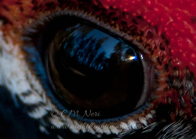 "Forest reflected in a Spruce Grouse's eye  © 2011 C. M. Neri.  Chippewa County, MI SPGREYE  <div class=""ss-paypal-button""><div class=""ss-paypal-add-to-cart-section""><div class=""ss-paypal-product-options""><h4>Mat Sizes</h4><ul><li><a href=""https://www.paypal.com/cgi-bin/webscr?cmd=_cart&amp;business=T77V5VKCW4K2U&amp;lc=US&amp;item_name=Forest%20reflected%20in%20a%20Spruce%20Grouse's%20eye%20%20%C2%A9%202011%20C.%20M.%20Neri.%20%20Chippewa%20County%2C%20MI%20SPGREYE&amp;item_number=http%3A%2F%2Fwww.nightflightimages.com%2FGalleries-1%2FImpressions%2Fi-5W56rzV&amp;button_subtype=products&amp;no_note=0&amp;cn=Add%20special%20instructions%20to%20the%20seller%3A&amp;no_shipping=2&amp;currency_code=USD&amp;weight_unit=lbs&amp;add=1&amp;bn=PP-ShopCartBF%3Abtn_cart_SM.gif%3ANonHosted&amp;on0=Mat%20Sizes&amp;option_select0=5%20x%207&amp;option_amount0=10.00&amp;option_select1=8%20x%2010&amp;option_amount1=18.00&amp;option_select2=11%20x%2014&amp;option_amount2=28.00&amp;option_select3=card&amp;option_amount3=4.00&amp;option_index=0&amp;charset=utf-8&amp;submit=&amp;os0=5%20x%207"" target=""paypal""><span>5 x 7 $11.00 USD</span><img src=""https://www.paypalobjects.com/en_US/i/btn/btn_cart_SM.gif""></a></li><li><a href=""https://www.paypal.com/cgi-bin/webscr?cmd=_cart&amp;business=T77V5VKCW4K2U&amp;lc=US&amp;item_name=Forest%20reflected%20in%20a%20Spruce%20Grouse's%20eye%20%20%C2%A9%202011%20C.%20M.%20Neri.%20%20Chippewa%20County%2C%20MI%20SPGREYE&amp;item_number=http%3A%2F%2Fwww.nightflightimages.com%2FGalleries-1%2FImpressions%2Fi-5W56rzV&amp;button_subtype=products&amp;no_note=0&amp;cn=Add%20special%20instructions%20to%20the%20seller%3A&amp;no_shipping=2&amp;currency_code=USD&amp;weight_unit=lbs&amp;add=1&amp;bn=PP-ShopCartBF%3Abtn_cart_SM.gif%3ANonHosted&amp;on0=Mat%20Sizes&amp;option_select0=5%20x%207&amp;option_amount0=10.00&amp;option_select1=8%20x%2010&amp;option_amount1=18.00&amp;option_select2=11%20x%2014&amp;option_amount2=28.00&amp;option_select3=card&amp;option_amount3=4.00&amp;option_index=0&amp;charset=utf-8&amp;submit=&amp;os0=8%20x%2010"" target=""paypal""><span>8 x 10 $19.00 USD</span><img src=""https://www.paypalobjects.com/en_US/i/btn/btn_cart_SM.gif""></a></li><li><a href=""https://www.paypal.com/cgi-bin/webscr?cmd=_cart&amp;business=T77V5VKCW4K2U&amp;lc=US&amp;item_name=Forest%20reflected%20in%20a%20Spruce%20Grouse's%20eye%20%20%C2%A9%202011%20C.%20M.%20Neri.%20%20Chippewa%20County%2C%20MI%20SPGREYE&amp;item_number=http%3A%2F%2Fwww.nightflightimages.com%2FGalleries-1%2FImpressions%2Fi-5W56rzV&amp;button_subtype=products&amp;no_note=0&amp;cn=Add%20special%20instructions%20to%20the%20seller%3A&amp;no_shipping=2&amp;currency_code=USD&amp;weight_unit=lbs&amp;add=1&amp;bn=PP-ShopCartBF%3Abtn_cart_SM.gif%3ANonHosted&amp;on0=Mat%20Sizes&amp;option_select0=5%20x%207&amp;option_amount0=10.00&amp;option_select1=8%20x%2010&amp;option_amount1=18.00&amp;option_select2=11%20x%2014&amp;option_amount2=28.00&amp;option_select3=card&amp;option_amount3=4.00&amp;option_index=0&amp;charset=utf-8&amp;submit=&amp;os0=11%20x%2014"" target=""paypal""><span>11 x 14 $29.00 USD</span><img src=""https://www.paypalobjects.com/en_US/i/btn/btn_cart_SM.gif""></a></li><li><a href=""https://www.paypal.com/cgi-bin/webscr?cmd=_cart&amp;business=T77V5VKCW4K2U&amp;lc=US&amp;item_name=Forest%20reflected%20in%20a%20Spruce%20Grouse's%20eye%20%20%C2%A9%202011%20C.%20M.%20Neri.%20%20Chippewa%20County%2C%20MI%20SPGREYE&amp;item_number=http%3A%2F%2Fwww.nightflightimages.com%2FGalleries-1%2FImpressions%2Fi-5W56rzV&amp;button_subtype=products&amp;no_note=0&amp;cn=Add%20special%20instructions%20to%20the%20seller%3A&amp;no_shipping=2&amp;currency_code=USD&amp;weight_unit=lbs&amp;add=1&amp;bn=PP-ShopCartBF%3Abtn_cart_SM.gif%3ANonHosted&amp;on0=Mat%20Sizes&amp;option_select0=5%20x%207&amp;option_amount0=10.00&amp;option_select1=8%20x%2010&amp;option_amount1=18.00&amp;option_select2=11%20x%2014&amp;option_amount2=28.00&amp;option_select3=card&amp;option_amount3=4.00&amp;option_index=0&amp;charset=utf-8&amp;submit=&amp;os0=card"" target=""paypal""><span>card $5.00 USD</span><img src=""https://www.paypalobjects.com/en_US/i/btn/btn_cart_SM.gif""></a></li></ul></div></div> <div class=""ss-paypal-view-cart-section""><a href=""https://www.paypal.com/cgi-bin/webscr?cmd=_cart&amp;business=T77V5VKCW4K2U&amp;display=1&amp;item_name=Forest%20reflected%20in%20a%20Spruce%20Grouse's%20eye%20%20%C2%A9%202011%20C.%20M.%20Neri.%20%20Chippewa%20County%2C%20MI%20SPGREYE&amp;item_number=http%3A%2F%2Fwww.nightflightimages.com%2FGalleries-1%2FImpressions%2Fi-5W56rzV&amp;charset=utf-8&amp;submit="" target=""paypal"" class=""ss-paypal-submit-button""><img src=""https://www.paypalobjects.com/en_US/i/btn/btn_viewcart_LG.gif""></a></div></div><div class=""ss-paypal-button-end""></div>"